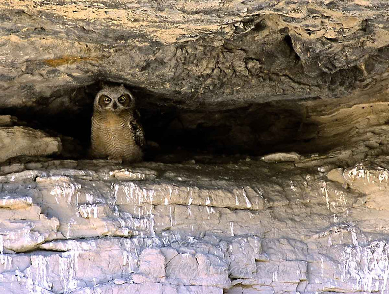 "Great Horned Owl chick in canyon wall  © 2002 C.M. Neri Snake River Canyon, ID GHOWCH  <div class=""ss-paypal-button""><div class=""ss-paypal-add-to-cart-section""><div class=""ss-paypal-product-options""><h4>Mat Sizes</h4><ul><li><a href=""https://www.paypal.com/cgi-bin/webscr?cmd=_cart&amp;business=T77V5VKCW4K2U&amp;lc=US&amp;item_name=Great%20Horned%20Owl%20chick%20in%20canyon%20wall%20%20%C2%A9%202002%20C.M.%20Neri%20Snake%20River%20Canyon%2C%20ID%20GHOWCH&amp;item_number=http%3A%2F%2Fwww.nightflightimages.com%2FGalleries-1%2FTravels%2Fi-hn5X4hj&amp;button_subtype=products&amp;no_note=0&amp;cn=Add%20special%20instructions%20to%20the%20seller%3A&amp;no_shipping=2&amp;currency_code=USD&amp;weight_unit=lbs&amp;add=1&amp;bn=PP-ShopCartBF%3Abtn_cart_SM.gif%3ANonHosted&amp;on0=Mat%20Sizes&amp;option_select0=5%20x%207&amp;option_amount0=10.00&amp;option_select1=8%20x%2010&amp;option_amount1=18.00&amp;option_select2=11%20x%2014&amp;option_amount2=28.00&amp;option_select3=card&amp;option_amount3=4.00&amp;option_index=0&amp;charset=utf-8&amp;submit=&amp;os0=5%20x%207"" target=""paypal""><span>5 x 7 $11.00 USD</span><img src=""https://www.paypalobjects.com/en_US/i/btn/btn_cart_SM.gif""></a></li><li><a href=""https://www.paypal.com/cgi-bin/webscr?cmd=_cart&amp;business=T77V5VKCW4K2U&amp;lc=US&amp;item_name=Great%20Horned%20Owl%20chick%20in%20canyon%20wall%20%20%C2%A9%202002%20C.M.%20Neri%20Snake%20River%20Canyon%2C%20ID%20GHOWCH&amp;item_number=http%3A%2F%2Fwww.nightflightimages.com%2FGalleries-1%2FTravels%2Fi-hn5X4hj&amp;button_subtype=products&amp;no_note=0&amp;cn=Add%20special%20instructions%20to%20the%20seller%3A&amp;no_shipping=2&amp;currency_code=USD&amp;weight_unit=lbs&amp;add=1&amp;bn=PP-ShopCartBF%3Abtn_cart_SM.gif%3ANonHosted&amp;on0=Mat%20Sizes&amp;option_select0=5%20x%207&amp;option_amount0=10.00&amp;option_select1=8%20x%2010&amp;option_amount1=18.00&amp;option_select2=11%20x%2014&amp;option_amount2=28.00&amp;option_select3=card&amp;option_amount3=4.00&amp;option_index=0&amp;charset=utf-8&amp;submit=&amp;os0=8%20x%2010"" target=""paypal""><span>8 x 10 $19.00 USD</span><img src=""https://www.paypalobjects.com/en_US/i/btn/btn_cart_SM.gif""></a></li><li><a href=""https://www.paypal.com/cgi-bin/webscr?cmd=_cart&amp;business=T77V5VKCW4K2U&amp;lc=US&amp;item_name=Great%20Horned%20Owl%20chick%20in%20canyon%20wall%20%20%C2%A9%202002%20C.M.%20Neri%20Snake%20River%20Canyon%2C%20ID%20GHOWCH&amp;item_number=http%3A%2F%2Fwww.nightflightimages.com%2FGalleries-1%2FTravels%2Fi-hn5X4hj&amp;button_subtype=products&amp;no_note=0&amp;cn=Add%20special%20instructions%20to%20the%20seller%3A&amp;no_shipping=2&amp;currency_code=USD&amp;weight_unit=lbs&amp;add=1&amp;bn=PP-ShopCartBF%3Abtn_cart_SM.gif%3ANonHosted&amp;on0=Mat%20Sizes&amp;option_select0=5%20x%207&amp;option_amount0=10.00&amp;option_select1=8%20x%2010&amp;option_amount1=18.00&amp;option_select2=11%20x%2014&amp;option_amount2=28.00&amp;option_select3=card&amp;option_amount3=4.00&amp;option_index=0&amp;charset=utf-8&amp;submit=&amp;os0=11%20x%2014"" target=""paypal""><span>11 x 14 $29.00 USD</span><img src=""https://www.paypalobjects.com/en_US/i/btn/btn_cart_SM.gif""></a></li><li><a href=""https://www.paypal.com/cgi-bin/webscr?cmd=_cart&amp;business=T77V5VKCW4K2U&amp;lc=US&amp;item_name=Great%20Horned%20Owl%20chick%20in%20canyon%20wall%20%20%C2%A9%202002%20C.M.%20Neri%20Snake%20River%20Canyon%2C%20ID%20GHOWCH&amp;item_number=http%3A%2F%2Fwww.nightflightimages.com%2FGalleries-1%2FTravels%2Fi-hn5X4hj&amp;button_subtype=products&amp;no_note=0&amp;cn=Add%20special%20instructions%20to%20the%20seller%3A&amp;no_shipping=2&amp;currency_code=USD&amp;weight_unit=lbs&amp;add=1&amp;bn=PP-ShopCartBF%3Abtn_cart_SM.gif%3ANonHosted&amp;on0=Mat%20Sizes&amp;option_select0=5%20x%207&amp;option_amount0=10.00&amp;option_select1=8%20x%2010&amp;option_amount1=18.00&amp;option_select2=11%20x%2014&amp;option_amount2=28.00&amp;option_select3=card&amp;option_amount3=4.00&amp;option_index=0&amp;charset=utf-8&amp;submit=&amp;os0=card"" target=""paypal""><span>card $5.00 USD</span><img src=""https://www.paypalobjects.com/en_US/i/btn/btn_cart_SM.gif""></a></li></ul></div></div> <div class=""ss-paypal-view-cart-section""><a href=""https://www.paypal.com/cgi-bin/webscr?cmd=_cart&amp;business=T77V5VKCW4K2U&amp;display=1&amp;item_name=Great%20Horned%20Owl%20chick%20in%20canyon%20wall%20%20%C2%A9%202002%20C.M.%20Neri%20Snake%20River%20Canyon%2C%20ID%20GHOWCH&amp;item_number=http%3A%2F%2Fwww.nightflightimages.com%2FGalleries-1%2FTravels%2Fi-hn5X4hj&amp;charset=utf-8&amp;submit="" target=""paypal"" class=""ss-paypal-submit-button""><img src=""https://www.paypalobjects.com/en_US/i/btn/btn_viewcart_LG.gif""></a></div></div><div class=""ss-paypal-button-end""></div>"