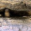 "Great Horned Owl chick in canyon wall  © 2002 C.M. Neri Snake River Canyon, ID GHOWCH  <div class=""ss-paypal-button""><div class=""ss-paypal-add-to-cart-section""><div class=""ss-paypal-product-options""><h4>Mat Sizes</h4><ul><li><a href=""https://www.paypal.com/cgi-bin/webscr?cmd=_cart&business=T77V5VKCW4K2U&lc=US&item_name=Great%20Horned%20Owl%20chick%20in%20canyon%20wall%20%20%C2%A9%202002%20C.M.%20Neri%20Snake%20River%20Canyon%2C%20ID%20GHOWCH&item_number=http%3A%2F%2Fwww.nightflightimages.com%2FGalleries-1%2FTravels%2Fi-hn5X4hj&button_subtype=products&no_note=0&cn=Add%20special%20instructions%20to%20the%20seller%3A&no_shipping=2&currency_code=USD&weight_unit=lbs&add=1&bn=PP-ShopCartBF%3Abtn_cart_SM.gif%3ANonHosted&on0=Mat%20Sizes&option_select0=5%20x%207&option_amount0=10.00&option_select1=8%20x%2010&option_amount1=18.00&option_select2=11%20x%2014&option_amount2=28.00&option_select3=card&option_amount3=4.00&option_index=0&charset=utf-8&submit=&os0=5%20x%207"" target=""paypal""><span>5 x 7 $11.00 USD</span><img src=""https://www.paypalobjects.com/en_US/i/btn/btn_cart_SM.gif""></a></li><li><a href=""https://www.paypal.com/cgi-bin/webscr?cmd=_cart&business=T77V5VKCW4K2U&lc=US&item_name=Great%20Horned%20Owl%20chick%20in%20canyon%20wall%20%20%C2%A9%202002%20C.M.%20Neri%20Snake%20River%20Canyon%2C%20ID%20GHOWCH&item_number=http%3A%2F%2Fwww.nightflightimages.com%2FGalleries-1%2FTravels%2Fi-hn5X4hj&button_subtype=products&no_note=0&cn=Add%20special%20instructions%20to%20the%20seller%3A&no_shipping=2&currency_code=USD&weight_unit=lbs&add=1&bn=PP-ShopCartBF%3Abtn_cart_SM.gif%3ANonHosted&on0=Mat%20Sizes&option_select0=5%20x%207&option_amount0=10.00&option_select1=8%20x%2010&option_amount1=18.00&option_select2=11%20x%2014&option_amount2=28.00&option_select3=card&option_amount3=4.00&option_index=0&charset=utf-8&submit=&os0=8%20x%2010"" target=""paypal""><span>8 x 10 $19.00 USD</span><img src=""https://www.paypalobjects.com/en_US/i/btn/btn_cart_SM.gif""></a></li><li><a href=""https://www.paypal.com/cgi-bin/webscr?cmd=_cart&business=T77V5VKCW4K2U&lc=US&item_name=Great%20Horned%20Owl%20chick%20in%20canyon%20wall%20%20%C2%A9%202002%20C.M.%20Neri%20Snake%20River%20Canyon%2C%20ID%20GHOWCH&item_number=http%3A%2F%2Fwww.nightflightimages.com%2FGalleries-1%2FTravels%2Fi-hn5X4hj&button_subtype=products&no_note=0&cn=Add%20special%20instructions%20to%20the%20seller%3A&no_shipping=2&currency_code=USD&weight_unit=lbs&add=1&bn=PP-ShopCartBF%3Abtn_cart_SM.gif%3ANonHosted&on0=Mat%20Sizes&option_select0=5%20x%207&option_amount0=10.00&option_select1=8%20x%2010&option_amount1=18.00&option_select2=11%20x%2014&option_amount2=28.00&option_select3=card&option_amount3=4.00&option_index=0&charset=utf-8&submit=&os0=11%20x%2014"" target=""paypal""><span>11 x 14 $29.00 USD</span><img src=""https://www.paypalobjects.com/en_US/i/btn/btn_cart_SM.gif""></a></li><li><a href=""https://www.paypal.com/cgi-bin/webscr?cmd=_cart&business=T77V5VKCW4K2U&lc=US&item_name=Great%20Horned%20Owl%20chick%20in%20canyon%20wall%20%20%C2%A9%202002%20C.M.%20Neri%20Snake%20River%20Canyon%2C%20ID%20GHOWCH&item_number=http%3A%2F%2Fwww.nightflightimages.com%2FGalleries-1%2FTravels%2Fi-hn5X4hj&button_subtype=products&no_note=0&cn=Add%20special%20instructions%20to%20the%20seller%3A&no_shipping=2&currency_code=USD&weight_unit=lbs&add=1&bn=PP-ShopCartBF%3Abtn_cart_SM.gif%3ANonHosted&on0=Mat%20Sizes&option_select0=5%20x%207&option_amount0=10.00&option_select1=8%20x%2010&option_amount1=18.00&option_select2=11%20x%2014&option_amount2=28.00&option_select3=card&option_amount3=4.00&option_index=0&charset=utf-8&submit=&os0=card"" target=""paypal""><span>card $5.00 USD</span><img src=""https://www.paypalobjects.com/en_US/i/btn/btn_cart_SM.gif""></a></li></ul></div></div> <div class=""ss-paypal-view-cart-section""><a href=""https://www.paypal.com/cgi-bin/webscr?cmd=_cart&business=T77V5VKCW4K2U&display=1&item_name=Great%20Horned%20Owl%20chick%20in%20canyon%20wall%20%20%C2%A9%202002%20C.M.%20Neri%20Snake%20River%20Canyon%2C%20ID%20GHOWCH&item_number=http%3A%2F%2Fwww.nightflightimages.com%2FGalleries-1%2FTravels%2Fi-hn5X4hj&charset=utf-8&submit="" target=""paypal"" class=""ss-paypal-submit-button""><img src=""https://www.paypalobjects.com/en_US/i/btn/btn_viewcart_LG.gif""></a></div></div><div class=""ss-paypal-button-end""></div>"