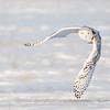 "Snowy Owl in flight © 2007 Nova Mackentley Amherst Island, ON SNF  <div class=""ss-paypal-button""><div class=""ss-paypal-add-to-cart-section""><div class=""ss-paypal-product-options""><h4>Mat Sizes</h4><ul><li><a href=""https://www.paypal.com/cgi-bin/webscr?cmd=_cart&business=T77V5VKCW4K2U&lc=US&item_name=Snowy%20Owl%20in%20flight%20%C2%A9%202007%20Nova%20Mackentley%20Amherst%20Island%2C%20ON%20SNF&item_number=http%3A%2F%2Fwww.nightflightimages.com%2FGalleries-1%2FTravels%2Fi-jcGDsR5&button_subtype=products&no_note=0&cn=Add%20special%20instructions%20to%20the%20seller%3A&no_shipping=2&currency_code=USD&weight_unit=lbs&add=1&bn=PP-ShopCartBF%3Abtn_cart_SM.gif%3ANonHosted&on0=Mat%20Sizes&option_select0=5%20x%207&option_amount0=10.00&option_select1=8%20x%2010&option_amount1=18.00&option_select2=11%20x%2014&option_amount2=28.00&option_select3=card&option_amount3=4.00&option_index=0&charset=utf-8&submit=&os0=5%20x%207"" target=""paypal""><span>5 x 7 $11.00 USD</span><img src=""https://www.paypalobjects.com/en_US/i/btn/btn_cart_SM.gif""></a></li><li><a href=""https://www.paypal.com/cgi-bin/webscr?cmd=_cart&business=T77V5VKCW4K2U&lc=US&item_name=Snowy%20Owl%20in%20flight%20%C2%A9%202007%20Nova%20Mackentley%20Amherst%20Island%2C%20ON%20SNF&item_number=http%3A%2F%2Fwww.nightflightimages.com%2FGalleries-1%2FTravels%2Fi-jcGDsR5&button_subtype=products&no_note=0&cn=Add%20special%20instructions%20to%20the%20seller%3A&no_shipping=2&currency_code=USD&weight_unit=lbs&add=1&bn=PP-ShopCartBF%3Abtn_cart_SM.gif%3ANonHosted&on0=Mat%20Sizes&option_select0=5%20x%207&option_amount0=10.00&option_select1=8%20x%2010&option_amount1=18.00&option_select2=11%20x%2014&option_amount2=28.00&option_select3=card&option_amount3=4.00&option_index=0&charset=utf-8&submit=&os0=8%20x%2010"" target=""paypal""><span>8 x 10 $19.00 USD</span><img src=""https://www.paypalobjects.com/en_US/i/btn/btn_cart_SM.gif""></a></li><li><a href=""https://www.paypal.com/cgi-bin/webscr?cmd=_cart&business=T77V5VKCW4K2U&lc=US&item_name=Snowy%20Owl%20in%20flight%20%C2%A9%202007%20Nova%20Mackentley%20Amherst%20Island%2C%20ON%20SNF&item_number=http%3A%2F%2Fwww.nightflightimages.com%2FGalleries-1%2FTravels%2Fi-jcGDsR5&button_subtype=products&no_note=0&cn=Add%20special%20instructions%20to%20the%20seller%3A&no_shipping=2&currency_code=USD&weight_unit=lbs&add=1&bn=PP-ShopCartBF%3Abtn_cart_SM.gif%3ANonHosted&on0=Mat%20Sizes&option_select0=5%20x%207&option_amount0=10.00&option_select1=8%20x%2010&option_amount1=18.00&option_select2=11%20x%2014&option_amount2=28.00&option_select3=card&option_amount3=4.00&option_index=0&charset=utf-8&submit=&os0=11%20x%2014"" target=""paypal""><span>11 x 14 $29.00 USD</span><img src=""https://www.paypalobjects.com/en_US/i/btn/btn_cart_SM.gif""></a></li><li><a href=""https://www.paypal.com/cgi-bin/webscr?cmd=_cart&business=T77V5VKCW4K2U&lc=US&item_name=Snowy%20Owl%20in%20flight%20%C2%A9%202007%20Nova%20Mackentley%20Amherst%20Island%2C%20ON%20SNF&item_number=http%3A%2F%2Fwww.nightflightimages.com%2FGalleries-1%2FTravels%2Fi-jcGDsR5&button_subtype=products&no_note=0&cn=Add%20special%20instructions%20to%20the%20seller%3A&no_shipping=2&currency_code=USD&weight_unit=lbs&add=1&bn=PP-ShopCartBF%3Abtn_cart_SM.gif%3ANonHosted&on0=Mat%20Sizes&option_select0=5%20x%207&option_amount0=10.00&option_select1=8%20x%2010&option_amount1=18.00&option_select2=11%20x%2014&option_amount2=28.00&option_select3=card&option_amount3=4.00&option_index=0&charset=utf-8&submit=&os0=card"" target=""paypal""><span>card $5.00 USD</span><img src=""https://www.paypalobjects.com/en_US/i/btn/btn_cart_SM.gif""></a></li></ul></div></div> <div class=""ss-paypal-view-cart-section""><a href=""https://www.paypal.com/cgi-bin/webscr?cmd=_cart&business=T77V5VKCW4K2U&display=1&item_name=Snowy%20Owl%20in%20flight%20%C2%A9%202007%20Nova%20Mackentley%20Amherst%20Island%2C%20ON%20SNF&item_number=http%3A%2F%2Fwww.nightflightimages.com%2FGalleries-1%2FTravels%2Fi-jcGDsR5&charset=utf-8&submit="" target=""paypal"" class=""ss-paypal-submit-button""><img src=""https://www.paypalobjects.com/en_US/i/btn/btn_viewcart_LG.gif""></a></div></div><div class=""ss-paypal-button-end""></div>"