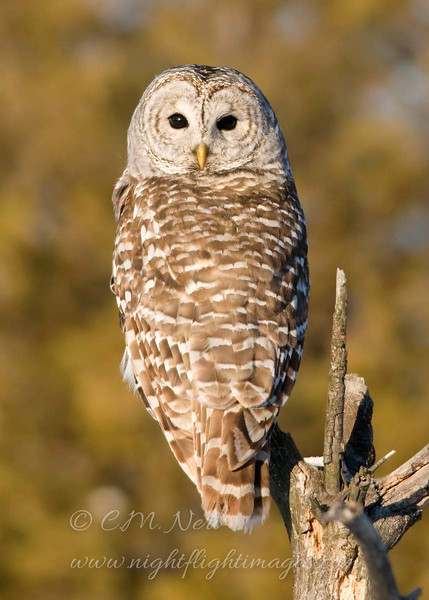 "Barred Owl © 2011 Chris M. Neri  Potsdam, NY BDOWNY  <div class=""ss-paypal-button""><div class=""ss-paypal-add-to-cart-section""><div class=""ss-paypal-product-options""><h4>Mat Sizes</h4><ul><li><a href=""https://www.paypal.com/cgi-bin/webscr?cmd=_cart&business=T77V5VKCW4K2U&lc=US&item_name=Barred%20Owl%20%C2%A9%202011%20Chris%20M.%20Neri%20%20Potsdam%2C%20NY%20BDOWNY&item_number=http%3A%2F%2Fwww.nightflightimages.com%2FGalleries-1%2FTravels%2Fi-jpRjQ5j&button_subtype=products&no_note=0&cn=Add%20special%20instructions%20to%20the%20seller%3A&no_shipping=2&currency_code=USD&weight_unit=lbs&add=1&bn=PP-ShopCartBF%3Abtn_cart_SM.gif%3ANonHosted&on0=Mat%20Sizes&option_select0=5%20x%207&option_amount0=10.00&option_select1=8%20x%2010&option_amount1=18.00&option_select2=11%20x%2014&option_amount2=28.00&option_select3=card&option_amount3=4.00&option_index=0&charset=utf-8&submit=&os0=5%20x%207"" target=""paypal""><span>5 x 7 $11.00 USD</span><img src=""https://www.paypalobjects.com/en_US/i/btn/btn_cart_SM.gif""></a></li><li><a href=""https://www.paypal.com/cgi-bin/webscr?cmd=_cart&business=T77V5VKCW4K2U&lc=US&item_name=Barred%20Owl%20%C2%A9%202011%20Chris%20M.%20Neri%20%20Potsdam%2C%20NY%20BDOWNY&item_number=http%3A%2F%2Fwww.nightflightimages.com%2FGalleries-1%2FTravels%2Fi-jpRjQ5j&button_subtype=products&no_note=0&cn=Add%20special%20instructions%20to%20the%20seller%3A&no_shipping=2&currency_code=USD&weight_unit=lbs&add=1&bn=PP-ShopCartBF%3Abtn_cart_SM.gif%3ANonHosted&on0=Mat%20Sizes&option_select0=5%20x%207&option_amount0=10.00&option_select1=8%20x%2010&option_amount1=18.00&option_select2=11%20x%2014&option_amount2=28.00&option_select3=card&option_amount3=4.00&option_index=0&charset=utf-8&submit=&os0=8%20x%2010"" target=""paypal""><span>8 x 10 $19.00 USD</span><img src=""https://www.paypalobjects.com/en_US/i/btn/btn_cart_SM.gif""></a></li><li><a href=""https://www.paypal.com/cgi-bin/webscr?cmd=_cart&business=T77V5VKCW4K2U&lc=US&item_name=Barred%20Owl%20%C2%A9%202011%20Chris%20M.%20Neri%20%20Potsdam%2C%20NY%20BDOWNY&item_number=http%3A%2F%2Fwww.nightflightimages.com%2FGalleries-1%2FTravels%2Fi-jpRjQ5j&button_subtype=products&no_note=0&cn=Add%20special%20instructions%20to%20the%20seller%3A&no_shipping=2&currency_code=USD&weight_unit=lbs&add=1&bn=PP-ShopCartBF%3Abtn_cart_SM.gif%3ANonHosted&on0=Mat%20Sizes&option_select0=5%20x%207&option_amount0=10.00&option_select1=8%20x%2010&option_amount1=18.00&option_select2=11%20x%2014&option_amount2=28.00&option_select3=card&option_amount3=4.00&option_index=0&charset=utf-8&submit=&os0=11%20x%2014"" target=""paypal""><span>11 x 14 $29.00 USD</span><img src=""https://www.paypalobjects.com/en_US/i/btn/btn_cart_SM.gif""></a></li><li><a href=""https://www.paypal.com/cgi-bin/webscr?cmd=_cart&business=T77V5VKCW4K2U&lc=US&item_name=Barred%20Owl%20%C2%A9%202011%20Chris%20M.%20Neri%20%20Potsdam%2C%20NY%20BDOWNY&item_number=http%3A%2F%2Fwww.nightflightimages.com%2FGalleries-1%2FTravels%2Fi-jpRjQ5j&button_subtype=products&no_note=0&cn=Add%20special%20instructions%20to%20the%20seller%3A&no_shipping=2&currency_code=USD&weight_unit=lbs&add=1&bn=PP-ShopCartBF%3Abtn_cart_SM.gif%3ANonHosted&on0=Mat%20Sizes&option_select0=5%20x%207&option_amount0=10.00&option_select1=8%20x%2010&option_amount1=18.00&option_select2=11%20x%2014&option_amount2=28.00&option_select3=card&option_amount3=4.00&option_index=0&charset=utf-8&submit=&os0=card"" target=""paypal""><span>card $5.00 USD</span><img src=""https://www.paypalobjects.com/en_US/i/btn/btn_cart_SM.gif""></a></li></ul></div></div> <div class=""ss-paypal-view-cart-section""><a href=""https://www.paypal.com/cgi-bin/webscr?cmd=_cart&business=T77V5VKCW4K2U&display=1&item_name=Barred%20Owl%20%C2%A9%202011%20Chris%20M.%20Neri%20%20Potsdam%2C%20NY%20BDOWNY&item_number=http%3A%2F%2Fwww.nightflightimages.com%2FGalleries-1%2FTravels%2Fi-jpRjQ5j&charset=utf-8&submit="" target=""paypal"" class=""ss-paypal-submit-button""><img src=""https://www.paypalobjects.com/en_US/i/btn/btn_viewcart_LG.gif""></a></div></div><div class=""ss-paypal-button-end""></div>"