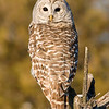 "Barred Owl © 2011 Chris M. Neri  Potsdam, NY BDOWNY  <div class=""ss-paypal-button""><div class=""ss-paypal-add-to-cart-section""><div class=""ss-paypal-product-options""><h4>Mat Sizes</h4><ul><li><a href=""https://www.paypal.com/cgi-bin/webscr?cmd=_cart&amp;business=T77V5VKCW4K2U&amp;lc=US&amp;item_name=Barred%20Owl%20%C2%A9%202011%20Chris%20M.%20Neri%20%20Potsdam%2C%20NY%20BDOWNY&amp;item_number=http%3A%2F%2Fwww.nightflightimages.com%2FGalleries-1%2FTravels%2Fi-jpRjQ5j&amp;button_subtype=products&amp;no_note=0&amp;cn=Add%20special%20instructions%20to%20the%20seller%3A&amp;no_shipping=2&amp;currency_code=USD&amp;weight_unit=lbs&amp;add=1&amp;bn=PP-ShopCartBF%3Abtn_cart_SM.gif%3ANonHosted&amp;on0=Mat%20Sizes&amp;option_select0=5%20x%207&amp;option_amount0=10.00&amp;option_select1=8%20x%2010&amp;option_amount1=18.00&amp;option_select2=11%20x%2014&amp;option_amount2=28.00&amp;option_select3=card&amp;option_amount3=4.00&amp;option_index=0&amp;charset=utf-8&amp;submit=&amp;os0=5%20x%207"" target=""paypal""><span>5 x 7 $11.00 USD</span><img src=""https://www.paypalobjects.com/en_US/i/btn/btn_cart_SM.gif""></a></li><li><a href=""https://www.paypal.com/cgi-bin/webscr?cmd=_cart&amp;business=T77V5VKCW4K2U&amp;lc=US&amp;item_name=Barred%20Owl%20%C2%A9%202011%20Chris%20M.%20Neri%20%20Potsdam%2C%20NY%20BDOWNY&amp;item_number=http%3A%2F%2Fwww.nightflightimages.com%2FGalleries-1%2FTravels%2Fi-jpRjQ5j&amp;button_subtype=products&amp;no_note=0&amp;cn=Add%20special%20instructions%20to%20the%20seller%3A&amp;no_shipping=2&amp;currency_code=USD&amp;weight_unit=lbs&amp;add=1&amp;bn=PP-ShopCartBF%3Abtn_cart_SM.gif%3ANonHosted&amp;on0=Mat%20Sizes&amp;option_select0=5%20x%207&amp;option_amount0=10.00&amp;option_select1=8%20x%2010&amp;option_amount1=18.00&amp;option_select2=11%20x%2014&amp;option_amount2=28.00&amp;option_select3=card&amp;option_amount3=4.00&amp;option_index=0&amp;charset=utf-8&amp;submit=&amp;os0=8%20x%2010"" target=""paypal""><span>8 x 10 $19.00 USD</span><img src=""https://www.paypalobjects.com/en_US/i/btn/btn_cart_SM.gif""></a></li><li><a href=""https://www.paypal.com/cgi-bin/webscr?cmd=_cart&amp;business=T77V5VKCW4K2U&amp;lc=US&amp;item_name=Barred%20Owl%20%C2%A9%202011%20Chris%20M.%20Neri%20%20Potsdam%2C%20NY%20BDOWNY&amp;item_number=http%3A%2F%2Fwww.nightflightimages.com%2FGalleries-1%2FTravels%2Fi-jpRjQ5j&amp;button_subtype=products&amp;no_note=0&amp;cn=Add%20special%20instructions%20to%20the%20seller%3A&amp;no_shipping=2&amp;currency_code=USD&amp;weight_unit=lbs&amp;add=1&amp;bn=PP-ShopCartBF%3Abtn_cart_SM.gif%3ANonHosted&amp;on0=Mat%20Sizes&amp;option_select0=5%20x%207&amp;option_amount0=10.00&amp;option_select1=8%20x%2010&amp;option_amount1=18.00&amp;option_select2=11%20x%2014&amp;option_amount2=28.00&amp;option_select3=card&amp;option_amount3=4.00&amp;option_index=0&amp;charset=utf-8&amp;submit=&amp;os0=11%20x%2014"" target=""paypal""><span>11 x 14 $29.00 USD</span><img src=""https://www.paypalobjects.com/en_US/i/btn/btn_cart_SM.gif""></a></li><li><a href=""https://www.paypal.com/cgi-bin/webscr?cmd=_cart&amp;business=T77V5VKCW4K2U&amp;lc=US&amp;item_name=Barred%20Owl%20%C2%A9%202011%20Chris%20M.%20Neri%20%20Potsdam%2C%20NY%20BDOWNY&amp;item_number=http%3A%2F%2Fwww.nightflightimages.com%2FGalleries-1%2FTravels%2Fi-jpRjQ5j&amp;button_subtype=products&amp;no_note=0&amp;cn=Add%20special%20instructions%20to%20the%20seller%3A&amp;no_shipping=2&amp;currency_code=USD&amp;weight_unit=lbs&amp;add=1&amp;bn=PP-ShopCartBF%3Abtn_cart_SM.gif%3ANonHosted&amp;on0=Mat%20Sizes&amp;option_select0=5%20x%207&amp;option_amount0=10.00&amp;option_select1=8%20x%2010&amp;option_amount1=18.00&amp;option_select2=11%20x%2014&amp;option_amount2=28.00&amp;option_select3=card&amp;option_amount3=4.00&amp;option_index=0&amp;charset=utf-8&amp;submit=&amp;os0=card"" target=""paypal""><span>card $5.00 USD</span><img src=""https://www.paypalobjects.com/en_US/i/btn/btn_cart_SM.gif""></a></li></ul></div></div> <div class=""ss-paypal-view-cart-section""><a href=""https://www.paypal.com/cgi-bin/webscr?cmd=_cart&amp;business=T77V5VKCW4K2U&amp;display=1&amp;item_name=Barred%20Owl%20%C2%A9%202011%20Chris%20M.%20Neri%20%20Potsdam%2C%20NY%20BDOWNY&amp;item_number=http%3A%2F%2Fwww.nightflightimages.com%2FGalleries-1%2FTravels%2Fi-jpRjQ5j&amp;charset=utf-8&amp;submit="" target=""paypal"" class=""ss-paypal-submit-button""><img src=""https://www.paypalobjects.com/en_US/i/btn/btn_viewcart_LG.gif""></a></div></div><div class=""ss-paypal-button-end""></div>"