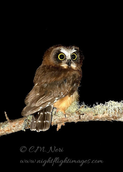 "Juvenile Northern Saw-whet Owl  © 2008 C. M. Neri Whitefish Point., MI NSWOJUV1ST  <div class=""ss-paypal-button""><div class=""ss-paypal-add-to-cart-section""><div class=""ss-paypal-product-options""><h4>Mat Sizes</h4><ul><li><a href=""https://www.paypal.com/cgi-bin/webscr?cmd=_cart&amp;business=T77V5VKCW4K2U&amp;lc=US&amp;item_name=Juvenile%20Northern%20Saw-whet%20Owl%20%20%C2%A9%202008%20C.%20M.%20Neri%20Whitefish%20Point.%2C%20MI%20NSWOJUV1ST&amp;item_number=http%3A%2F%2Fwww.nightflightimages.com%2FGalleries-1%2FUpper-Peninsula-of-MI%2Fi-n7GQFHv&amp;button_subtype=products&amp;no_note=0&amp;cn=Add%20special%20instructions%20to%20the%20seller%3A&amp;no_shipping=2&amp;currency_code=USD&amp;weight_unit=lbs&amp;add=1&amp;bn=PP-ShopCartBF%3Abtn_cart_SM.gif%3ANonHosted&amp;on0=Mat%20Sizes&amp;option_select0=5%20x%207&amp;option_amount0=10.00&amp;option_select1=8%20x%2010&amp;option_amount1=18.00&amp;option_select2=11%20x%2014&amp;option_amount2=28.00&amp;option_select3=card&amp;option_amount3=4.00&amp;option_index=0&amp;charset=utf-8&amp;submit=&amp;os0=5%20x%207"" target=""paypal""><span>5 x 7 $11.00 USD</span><img src=""https://www.paypalobjects.com/en_US/i/btn/btn_cart_SM.gif""></a></li><li><a href=""https://www.paypal.com/cgi-bin/webscr?cmd=_cart&amp;business=T77V5VKCW4K2U&amp;lc=US&amp;item_name=Juvenile%20Northern%20Saw-whet%20Owl%20%20%C2%A9%202008%20C.%20M.%20Neri%20Whitefish%20Point.%2C%20MI%20NSWOJUV1ST&amp;item_number=http%3A%2F%2Fwww.nightflightimages.com%2FGalleries-1%2FUpper-Peninsula-of-MI%2Fi-n7GQFHv&amp;button_subtype=products&amp;no_note=0&amp;cn=Add%20special%20instructions%20to%20the%20seller%3A&amp;no_shipping=2&amp;currency_code=USD&amp;weight_unit=lbs&amp;add=1&amp;bn=PP-ShopCartBF%3Abtn_cart_SM.gif%3ANonHosted&amp;on0=Mat%20Sizes&amp;option_select0=5%20x%207&amp;option_amount0=10.00&amp;option_select1=8%20x%2010&amp;option_amount1=18.00&amp;option_select2=11%20x%2014&amp;option_amount2=28.00&amp;option_select3=card&amp;option_amount3=4.00&amp;option_index=0&amp;charset=utf-8&amp;submit=&amp;os0=8%20x%2010"" target=""paypal""><span>8 x 10 $19.00 USD</span><img src=""https://www.paypalobjects.com/en_US/i/btn/btn_cart_SM.gif""></a></li><li><a href=""https://www.paypal.com/cgi-bin/webscr?cmd=_cart&amp;business=T77V5VKCW4K2U&amp;lc=US&amp;item_name=Juvenile%20Northern%20Saw-whet%20Owl%20%20%C2%A9%202008%20C.%20M.%20Neri%20Whitefish%20Point.%2C%20MI%20NSWOJUV1ST&amp;item_number=http%3A%2F%2Fwww.nightflightimages.com%2FGalleries-1%2FUpper-Peninsula-of-MI%2Fi-n7GQFHv&amp;button_subtype=products&amp;no_note=0&amp;cn=Add%20special%20instructions%20to%20the%20seller%3A&amp;no_shipping=2&amp;currency_code=USD&amp;weight_unit=lbs&amp;add=1&amp;bn=PP-ShopCartBF%3Abtn_cart_SM.gif%3ANonHosted&amp;on0=Mat%20Sizes&amp;option_select0=5%20x%207&amp;option_amount0=10.00&amp;option_select1=8%20x%2010&amp;option_amount1=18.00&amp;option_select2=11%20x%2014&amp;option_amount2=28.00&amp;option_select3=card&amp;option_amount3=4.00&amp;option_index=0&amp;charset=utf-8&amp;submit=&amp;os0=11%20x%2014"" target=""paypal""><span>11 x 14 $29.00 USD</span><img src=""https://www.paypalobjects.com/en_US/i/btn/btn_cart_SM.gif""></a></li><li><a href=""https://www.paypal.com/cgi-bin/webscr?cmd=_cart&amp;business=T77V5VKCW4K2U&amp;lc=US&amp;item_name=Juvenile%20Northern%20Saw-whet%20Owl%20%20%C2%A9%202008%20C.%20M.%20Neri%20Whitefish%20Point.%2C%20MI%20NSWOJUV1ST&amp;item_number=http%3A%2F%2Fwww.nightflightimages.com%2FGalleries-1%2FUpper-Peninsula-of-MI%2Fi-n7GQFHv&amp;button_subtype=products&amp;no_note=0&amp;cn=Add%20special%20instructions%20to%20the%20seller%3A&amp;no_shipping=2&amp;currency_code=USD&amp;weight_unit=lbs&amp;add=1&amp;bn=PP-ShopCartBF%3Abtn_cart_SM.gif%3ANonHosted&amp;on0=Mat%20Sizes&amp;option_select0=5%20x%207&amp;option_amount0=10.00&amp;option_select1=8%20x%2010&amp;option_amount1=18.00&amp;option_select2=11%20x%2014&amp;option_amount2=28.00&amp;option_select3=card&amp;option_amount3=4.00&amp;option_index=0&amp;charset=utf-8&amp;submit=&amp;os0=card"" target=""paypal""><span>card $5.00 USD</span><img src=""https://www.paypalobjects.com/en_US/i/btn/btn_cart_SM.gif""></a></li></ul></div></div> <div class=""ss-paypal-view-cart-section""><a href=""https://www.paypal.com/cgi-bin/webscr?cmd=_cart&amp;business=T77V5VKCW4K2U&amp;display=1&amp;item_name=Juvenile%20Northern%20Saw-whet%20Owl%20%20%C2%A9%202008%20C.%20M.%20Neri%20Whitefish%20Point.%2C%20MI%20NSWOJUV1ST&amp;item_number=http%3A%2F%2Fwww.nightflightimages.com%2FGalleries-1%2FUpper-Peninsula-of-MI%2Fi-n7GQFHv&amp;charset=utf-8&amp;submit="" target=""paypal"" class=""ss-paypal-submit-button""><img src=""https://www.paypalobjects.com/en_US/i/btn/btn_viewcart_LG.gif""></a></div></div><div class=""ss-paypal-button-end""></div>"