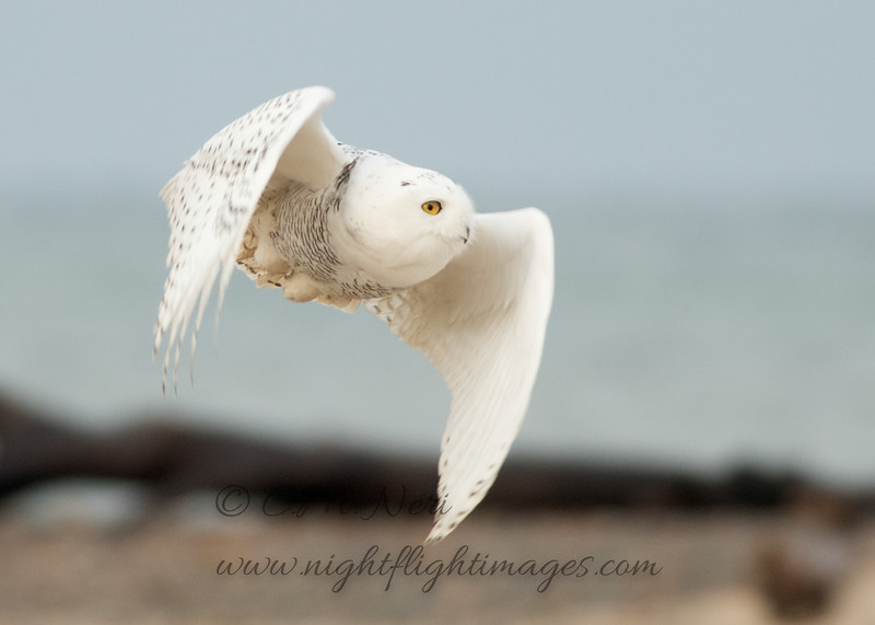"""Snowy Owl © 2017 Chris M Neri Whitefish Point, MI SN172  <div class=""""ss-paypal-button""""><div class=""""ss-paypal-add-to-cart-section""""><div class=""""ss-paypal-product-options""""><h4>Mat Sizes</h4><ul><li><a href=""""https://www.paypal.com/cgi-bin/webscr?cmd=_cart&business=T77V5VKCW4K2U&lc=US&item_name=Snowy%20Owl%20%C2%A9%202017%20Chris%20M%20Neri%20Whitefish%20Point%2C%20MI%20SN172&item_number=http%3A%2F%2Fwww.nightflightimages.com%2FGalleries-1%2FNew%2Fi-nbQC9Dx&button_subtype=products&no_note=0&cn=Add%20special%20instructions%20to%20the%20seller%3A&no_shipping=2&currency_code=USD&weight_unit=lbs&add=1&bn=PP-ShopCartBF%3Abtn_cart_SM.gif%3ANonHosted&on0=Mat%20Sizes&option_select0=5%20x%207&option_amount0=12.00&option_select1=8%20x%2010&option_amount1=19.00&option_select2=11%20x%2014&option_amount2=29.00&option_select3=card&option_amount3=5.00&option_index=0&charset=utf-8&submit=&os0=5%20x%207"""" target=""""paypal""""><span>5 x 7 $12.00 USD</span><img src=""""https://www.paypalobjects.com/en_US/i/btn/btn_cart_SM.gif""""></a></li><li><a href=""""https://www.paypal.com/cgi-bin/webscr?cmd=_cart&business=T77V5VKCW4K2U&lc=US&item_name=Snowy%20Owl%20%C2%A9%202017%20Chris%20M%20Neri%20Whitefish%20Point%2C%20MI%20SN172&item_number=http%3A%2F%2Fwww.nightflightimages.com%2FGalleries-1%2FNew%2Fi-nbQC9Dx&button_subtype=products&no_note=0&cn=Add%20special%20instructions%20to%20the%20seller%3A&no_shipping=2&currency_code=USD&weight_unit=lbs&add=1&bn=PP-ShopCartBF%3Abtn_cart_SM.gif%3ANonHosted&on0=Mat%20Sizes&option_select0=5%20x%207&option_amount0=12.00&option_select1=8%20x%2010&option_amount1=19.00&option_select2=11%20x%2014&option_amount2=29.00&option_select3=card&option_amount3=5.00&option_index=0&charset=utf-8&submit=&os0=8%20x%2010"""" target=""""paypal""""><span>8 x 10 $19.00 USD</span><img src=""""https://www.paypalobjects.com/en_US/i/btn/btn_cart_SM.gif""""></a></li><li><a href=""""https://www.paypal.com/cgi-bin/webscr?cmd=_cart&business=T77V5VKCW4K2U&lc=US&item_name=Snowy%20Owl%20%C2%A9%202017%20Chris%20M%20Neri%20Wh"""