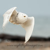 "Snowy Owl © 2017 Chris M Neri Whitefish Point, MI SN172  <div class=""ss-paypal-button""><div class=""ss-paypal-add-to-cart-section""><div class=""ss-paypal-product-options""><h4>Mat Sizes</h4><ul><li><a href=""https://www.paypal.com/cgi-bin/webscr?cmd=_cart&business=T77V5VKCW4K2U&lc=US&item_name=Snowy%20Owl%20%C2%A9%202017%20Chris%20M%20Neri%20Whitefish%20Point%2C%20MI%20SN172&item_number=http%3A%2F%2Fwww.nightflightimages.com%2FGalleries-1%2FNew%2Fi-nbQC9Dx&button_subtype=products&no_note=0&cn=Add%20special%20instructions%20to%20the%20seller%3A&no_shipping=2&currency_code=USD&weight_unit=lbs&add=1&bn=PP-ShopCartBF%3Abtn_cart_SM.gif%3ANonHosted&on0=Mat%20Sizes&option_select0=5%20x%207&option_amount0=12.00&option_select1=8%20x%2010&option_amount1=19.00&option_select2=11%20x%2014&option_amount2=29.00&option_select3=card&option_amount3=5.00&option_index=0&charset=utf-8&submit=&os0=5%20x%207"" target=""paypal""><span>5 x 7 $12.00 USD</span><img src=""https://www.paypalobjects.com/en_US/i/btn/btn_cart_SM.gif""></a></li><li><a href=""https://www.paypal.com/cgi-bin/webscr?cmd=_cart&business=T77V5VKCW4K2U&lc=US&item_name=Snowy%20Owl%20%C2%A9%202017%20Chris%20M%20Neri%20Whitefish%20Point%2C%20MI%20SN172&item_number=http%3A%2F%2Fwww.nightflightimages.com%2FGalleries-1%2FNew%2Fi-nbQC9Dx&button_subtype=products&no_note=0&cn=Add%20special%20instructions%20to%20the%20seller%3A&no_shipping=2&currency_code=USD&weight_unit=lbs&add=1&bn=PP-ShopCartBF%3Abtn_cart_SM.gif%3ANonHosted&on0=Mat%20Sizes&option_select0=5%20x%207&option_amount0=12.00&option_select1=8%20x%2010&option_amount1=19.00&option_select2=11%20x%2014&option_amount2=29.00&option_select3=card&option_amount3=5.00&option_index=0&charset=utf-8&submit=&os0=8%20x%2010"" target=""paypal""><span>8 x 10 $19.00 USD</span><img src=""https://www.paypalobjects.com/en_US/i/btn/btn_cart_SM.gif""></a></li><li><a href=""https://www.paypal.com/cgi-bin/webscr?cmd=_cart&business=T77V5VKCW4K2U&lc=US&item_name=Snowy%20Owl%20%C2%A9%202017%20Chris%20M%20Neri%20Whitefish%20Point%2C%20MI%20SN172&item_number=http%3A%2F%2Fwww.nightflightimages.com%2FGalleries-1%2FNew%2Fi-nbQC9Dx&button_subtype=products&no_note=0&cn=Add%20special%20instructions%20to%20the%20seller%3A&no_shipping=2&currency_code=USD&weight_unit=lbs&add=1&bn=PP-ShopCartBF%3Abtn_cart_SM.gif%3ANonHosted&on0=Mat%20Sizes&option_select0=5%20x%207&option_amount0=12.00&option_select1=8%20x%2010&option_amount1=19.00&option_select2=11%20x%2014&option_amount2=29.00&option_select3=card&option_amount3=5.00&option_index=0&charset=utf-8&submit=&os0=11%20x%2014"" target=""paypal""><span>11 x 14 $29.00 USD</span><img src=""https://www.paypalobjects.com/en_US/i/btn/btn_cart_SM.gif""></a></li><li><a href=""https://www.paypal.com/cgi-bin/webscr?cmd=_cart&business=T77V5VKCW4K2U&lc=US&item_name=Snowy%20Owl%20%C2%A9%202017%20Chris%20M%20Neri%20Whitefish%20Point%2C%20MI%20SN172&item_number=http%3A%2F%2Fwww.nightflightimages.com%2FGalleries-1%2FNew%2Fi-nbQC9Dx&button_subtype=products&no_note=0&cn=Add%20special%20instructions%20to%20the%20seller%3A&no_shipping=2&currency_code=USD&weight_unit=lbs&add=1&bn=PP-ShopCartBF%3Abtn_cart_SM.gif%3ANonHosted&on0=Mat%20Sizes&option_select0=5%20x%207&option_amount0=12.00&option_select1=8%20x%2010&option_amount1=19.00&option_select2=11%20x%2014&option_amount2=29.00&option_select3=card&option_amount3=5.00&option_index=0&charset=utf-8&submit=&os0=card"" target=""paypal""><span>card $5.00 USD</span><img src=""https://www.paypalobjects.com/en_US/i/btn/btn_cart_SM.gif""></a></li></ul></div></div> <div class=""ss-paypal-view-cart-section""><a href=""https://www.paypal.com/cgi-bin/webscr?cmd=_cart&business=T77V5VKCW4K2U&display=1&item_name=Snowy%20Owl%20%C2%A9%202017%20Chris%20M%20Neri%20Whitefish%20Point%2C%20MI%20SN172&item_number=http%3A%2F%2Fwww.nightflightimages.com%2FGalleries-1%2FNew%2Fi-nbQC9Dx&charset=utf-8&submit="" target=""paypal"" class=""ss-paypal-submit-button""><img src=""https://www.paypalobjects.com/en_US/i/btn/btn_viewcart_LG.gif""></a></div></div><div class=""ss-paypal-button-end""></div>"