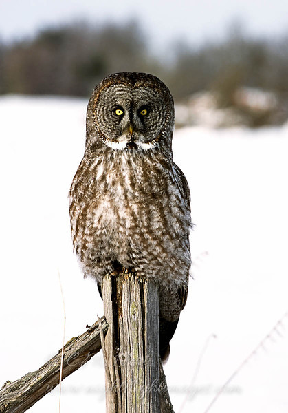 "Great Gray Owl  © 2005 C. M. Neri Aitkin County, MN GGOWPOST  <div class=""ss-paypal-button""><div class=""ss-paypal-add-to-cart-section""><div class=""ss-paypal-product-options""><h4>Mat Sizes</h4><ul><li><a href=""https://www.paypal.com/cgi-bin/webscr?cmd=_cart&amp;business=T77V5VKCW4K2U&amp;lc=US&amp;item_name=Great%20Gray%20Owl%20%20%C2%A9%202005%20C.%20M.%20Neri%20Aitkin%20County%2C%20MN%20GGOWPOST&amp;item_number=http%3A%2F%2Fwww.nightflightimages.com%2FGalleries-1%2FTravels%2Fi-pj5zhdH&amp;button_subtype=products&amp;no_note=0&amp;cn=Add%20special%20instructions%20to%20the%20seller%3A&amp;no_shipping=2&amp;currency_code=USD&amp;weight_unit=lbs&amp;add=1&amp;bn=PP-ShopCartBF%3Abtn_cart_SM.gif%3ANonHosted&amp;on0=Mat%20Sizes&amp;option_select0=5%20x%207&amp;option_amount0=10.00&amp;option_select1=8%20x%2010&amp;option_amount1=18.00&amp;option_select2=11%20x%2014&amp;option_amount2=28.00&amp;option_select3=card&amp;option_amount3=4.00&amp;option_index=0&amp;charset=utf-8&amp;submit=&amp;os0=5%20x%207"" target=""paypal""><span>5 x 7 $11.00 USD</span><img src=""https://www.paypalobjects.com/en_US/i/btn/btn_cart_SM.gif""></a></li><li><a href=""https://www.paypal.com/cgi-bin/webscr?cmd=_cart&amp;business=T77V5VKCW4K2U&amp;lc=US&amp;item_name=Great%20Gray%20Owl%20%20%C2%A9%202005%20C.%20M.%20Neri%20Aitkin%20County%2C%20MN%20GGOWPOST&amp;item_number=http%3A%2F%2Fwww.nightflightimages.com%2FGalleries-1%2FTravels%2Fi-pj5zhdH&amp;button_subtype=products&amp;no_note=0&amp;cn=Add%20special%20instructions%20to%20the%20seller%3A&amp;no_shipping=2&amp;currency_code=USD&amp;weight_unit=lbs&amp;add=1&amp;bn=PP-ShopCartBF%3Abtn_cart_SM.gif%3ANonHosted&amp;on0=Mat%20Sizes&amp;option_select0=5%20x%207&amp;option_amount0=10.00&amp;option_select1=8%20x%2010&amp;option_amount1=18.00&amp;option_select2=11%20x%2014&amp;option_amount2=28.00&amp;option_select3=card&amp;option_amount3=4.00&amp;option_index=0&amp;charset=utf-8&amp;submit=&amp;os0=8%20x%2010"" target=""paypal""><span>8 x 10 $19.00 USD</span><img src=""https://www.paypalobjects.com/en_US/i/btn/btn_cart_SM.gif""></a></li><li><a href=""https://www.paypal.com/cgi-bin/webscr?cmd=_cart&amp;business=T77V5VKCW4K2U&amp;lc=US&amp;item_name=Great%20Gray%20Owl%20%20%C2%A9%202005%20C.%20M.%20Neri%20Aitkin%20County%2C%20MN%20GGOWPOST&amp;item_number=http%3A%2F%2Fwww.nightflightimages.com%2FGalleries-1%2FTravels%2Fi-pj5zhdH&amp;button_subtype=products&amp;no_note=0&amp;cn=Add%20special%20instructions%20to%20the%20seller%3A&amp;no_shipping=2&amp;currency_code=USD&amp;weight_unit=lbs&amp;add=1&amp;bn=PP-ShopCartBF%3Abtn_cart_SM.gif%3ANonHosted&amp;on0=Mat%20Sizes&amp;option_select0=5%20x%207&amp;option_amount0=10.00&amp;option_select1=8%20x%2010&amp;option_amount1=18.00&amp;option_select2=11%20x%2014&amp;option_amount2=28.00&amp;option_select3=card&amp;option_amount3=4.00&amp;option_index=0&amp;charset=utf-8&amp;submit=&amp;os0=11%20x%2014"" target=""paypal""><span>11 x 14 $29.00 USD</span><img src=""https://www.paypalobjects.com/en_US/i/btn/btn_cart_SM.gif""></a></li><li><a href=""https://www.paypal.com/cgi-bin/webscr?cmd=_cart&amp;business=T77V5VKCW4K2U&amp;lc=US&amp;item_name=Great%20Gray%20Owl%20%20%C2%A9%202005%20C.%20M.%20Neri%20Aitkin%20County%2C%20MN%20GGOWPOST&amp;item_number=http%3A%2F%2Fwww.nightflightimages.com%2FGalleries-1%2FTravels%2Fi-pj5zhdH&amp;button_subtype=products&amp;no_note=0&amp;cn=Add%20special%20instructions%20to%20the%20seller%3A&amp;no_shipping=2&amp;currency_code=USD&amp;weight_unit=lbs&amp;add=1&amp;bn=PP-ShopCartBF%3Abtn_cart_SM.gif%3ANonHosted&amp;on0=Mat%20Sizes&amp;option_select0=5%20x%207&amp;option_amount0=10.00&amp;option_select1=8%20x%2010&amp;option_amount1=18.00&amp;option_select2=11%20x%2014&amp;option_amount2=28.00&amp;option_select3=card&amp;option_amount3=4.00&amp;option_index=0&amp;charset=utf-8&amp;submit=&amp;os0=card"" target=""paypal""><span>card $5.00 USD</span><img src=""https://www.paypalobjects.com/en_US/i/btn/btn_cart_SM.gif""></a></li></ul></div></div> <div class=""ss-paypal-view-cart-section""><a href=""https://www.paypal.com/cgi-bin/webscr?cmd=_cart&amp;business=T77V5VKCW4K2U&amp;display=1&amp;item_name=Great%20Gray%20Owl%20%20%C2%A9%202005%20C.%20M.%20Neri%20Aitkin%20County%2C%20MN%20GGOWPOST&amp;item_number=http%3A%2F%2Fwww.nightflightimages.com%2FGalleries-1%2FTravels%2Fi-pj5zhdH&amp;charset=utf-8&amp;submit="" target=""paypal"" class=""ss-paypal-submit-button""><img src=""https://www.paypalobjects.com/en_US/i/btn/btn_viewcart_LG.gif""></a></div></div><div class=""ss-paypal-button-end""></div>"