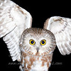 "Northern Saw-whet Owl in hand © 2008 Nova Mackentley Whitefish Point, MI SWI  <div class=""ss-paypal-button""><div class=""ss-paypal-add-to-cart-section""><div class=""ss-paypal-product-options""><h4>Mat Sizes</h4><ul><li><a href=""https://www.paypal.com/cgi-bin/webscr?cmd=_cart&business=T77V5VKCW4K2U&lc=US&item_name=Northern%20Saw-whet%20Owl%20in%20hand%20%C2%A9%202008%20Nova%20Mackentley%20Whitefish%20Point%2C%20MI%20SWI&item_number=http%3A%2F%2Fwww.nightflightimages.com%2FGalleries-1%2FOwls%2Fi-q9b25pQ&button_subtype=products&no_note=0&cn=Add%20special%20instructions%20to%20the%20seller%3A&no_shipping=2&currency_code=USD&weight_unit=lbs&add=1&bn=PP-ShopCartBF%3Abtn_cart_SM.gif%3ANonHosted&on0=Mat%20Sizes&option_select0=5%20x%207&option_amount0=10.00&option_select1=8%20x%2010&option_amount1=18.00&option_select2=11%20x%2014&option_amount2=28.00&option_select3=card&option_amount3=4.00&option_index=0&charset=utf-8&submit=&os0=5%20x%207"" target=""paypal""><span>5 x 7 $11.00 USD</span><img src=""https://www.paypalobjects.com/en_US/i/btn/btn_cart_SM.gif""></a></li><li><a href=""https://www.paypal.com/cgi-bin/webscr?cmd=_cart&business=T77V5VKCW4K2U&lc=US&item_name=Northern%20Saw-whet%20Owl%20in%20hand%20%C2%A9%202008%20Nova%20Mackentley%20Whitefish%20Point%2C%20MI%20SWI&item_number=http%3A%2F%2Fwww.nightflightimages.com%2FGalleries-1%2FOwls%2Fi-q9b25pQ&button_subtype=products&no_note=0&cn=Add%20special%20instructions%20to%20the%20seller%3A&no_shipping=2&currency_code=USD&weight_unit=lbs&add=1&bn=PP-ShopCartBF%3Abtn_cart_SM.gif%3ANonHosted&on0=Mat%20Sizes&option_select0=5%20x%207&option_amount0=10.00&option_select1=8%20x%2010&option_amount1=18.00&option_select2=11%20x%2014&option_amount2=28.00&option_select3=card&option_amount3=4.00&option_index=0&charset=utf-8&submit=&os0=8%20x%2010"" target=""paypal""><span>8 x 10 $19.00 USD</span><img src=""https://www.paypalobjects.com/en_US/i/btn/btn_cart_SM.gif""></a></li><li><a href=""https://www.paypal.com/cgi-bin/webscr?cmd=_cart&business=T77V5VKCW4K2U&lc=US&item_name=Northern%20Saw-whet%20Owl%20in%20hand%20%C2%A9%202008%20Nova%20Mackentley%20Whitefish%20Point%2C%20MI%20SWI&item_number=http%3A%2F%2Fwww.nightflightimages.com%2FGalleries-1%2FOwls%2Fi-q9b25pQ&button_subtype=products&no_note=0&cn=Add%20special%20instructions%20to%20the%20seller%3A&no_shipping=2&currency_code=USD&weight_unit=lbs&add=1&bn=PP-ShopCartBF%3Abtn_cart_SM.gif%3ANonHosted&on0=Mat%20Sizes&option_select0=5%20x%207&option_amount0=10.00&option_select1=8%20x%2010&option_amount1=18.00&option_select2=11%20x%2014&option_amount2=28.00&option_select3=card&option_amount3=4.00&option_index=0&charset=utf-8&submit=&os0=11%20x%2014"" target=""paypal""><span>11 x 14 $29.00 USD</span><img src=""https://www.paypalobjects.com/en_US/i/btn/btn_cart_SM.gif""></a></li><li><a href=""https://www.paypal.com/cgi-bin/webscr?cmd=_cart&business=T77V5VKCW4K2U&lc=US&item_name=Northern%20Saw-whet%20Owl%20in%20hand%20%C2%A9%202008%20Nova%20Mackentley%20Whitefish%20Point%2C%20MI%20SWI&item_number=http%3A%2F%2Fwww.nightflightimages.com%2FGalleries-1%2FOwls%2Fi-q9b25pQ&button_subtype=products&no_note=0&cn=Add%20special%20instructions%20to%20the%20seller%3A&no_shipping=2&currency_code=USD&weight_unit=lbs&add=1&bn=PP-ShopCartBF%3Abtn_cart_SM.gif%3ANonHosted&on0=Mat%20Sizes&option_select0=5%20x%207&option_amount0=10.00&option_select1=8%20x%2010&option_amount1=18.00&option_select2=11%20x%2014&option_amount2=28.00&option_select3=card&option_amount3=4.00&option_index=0&charset=utf-8&submit=&os0=card"" target=""paypal""><span>card $5.00 USD</span><img src=""https://www.paypalobjects.com/en_US/i/btn/btn_cart_SM.gif""></a></li></ul></div></div> <div class=""ss-paypal-view-cart-section""><a href=""https://www.paypal.com/cgi-bin/webscr?cmd=_cart&business=T77V5VKCW4K2U&display=1&item_name=Northern%20Saw-whet%20Owl%20in%20hand%20%C2%A9%202008%20Nova%20Mackentley%20Whitefish%20Point%2C%20MI%20SWI&item_number=http%3A%2F%2Fwww.nightflightimages.com%2FGalleries-1%2FOwls%2Fi-q9b25pQ&charset=utf-8&submit="" target=""paypal"" class=""ss-paypal-submit-button""><img src=""https://www.paypalobjects.com/en_US/i/btn/btn_viewcart_LG.gif""></a></div></div><div class=""ss-paypal-button-end""></div>"