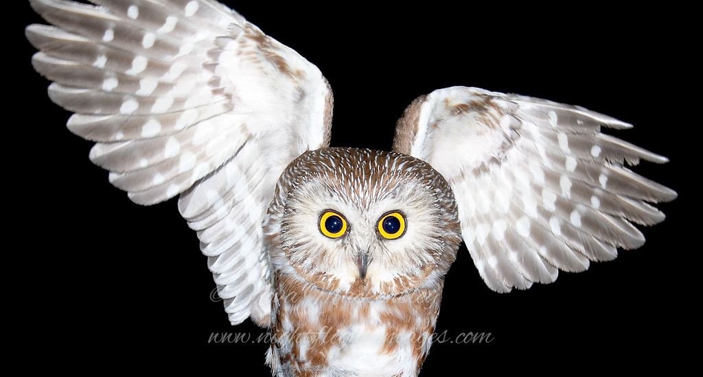 """Northern Saw-whet Owl in hand © 2008 Nova Mackentley Whitefish Point, MI SWI  <div class=""""ss-paypal-button""""><div class=""""ss-paypal-add-to-cart-section""""><div class=""""ss-paypal-product-options""""><h4>Mat Sizes</h4><ul><li><a href=""""https://www.paypal.com/cgi-bin/webscr?cmd=_cart&business=T77V5VKCW4K2U&lc=US&item_name=Northern%20Saw-whet%20Owl%20in%20hand%20%C2%A9%202008%20Nova%20Mackentley%20Whitefish%20Point%2C%20MI%20SWI&item_number=http%3A%2F%2Fwww.nightflightimages.com%2FGalleries-1%2FOwls%2Fi-q9b25pQ&button_subtype=products&no_note=0&cn=Add%20special%20instructions%20to%20the%20seller%3A&no_shipping=2&currency_code=USD&weight_unit=lbs&add=1&bn=PP-ShopCartBF%3Abtn_cart_SM.gif%3ANonHosted&on0=Mat%20Sizes&option_select0=5%20x%207&option_amount0=10.00&option_select1=8%20x%2010&option_amount1=18.00&option_select2=11%20x%2014&option_amount2=28.00&option_select3=card&option_amount3=4.00&option_index=0&charset=utf-8&submit=&os0=5%20x%207"""" target=""""paypal""""><span>5 x 7 $11.00 USD</span><img src=""""https://www.paypalobjects.com/en_US/i/btn/btn_cart_SM.gif""""></a></li><li><a href=""""https://www.paypal.com/cgi-bin/webscr?cmd=_cart&business=T77V5VKCW4K2U&lc=US&item_name=Northern%20Saw-whet%20Owl%20in%20hand%20%C2%A9%202008%20Nova%20Mackentley%20Whitefish%20Point%2C%20MI%20SWI&item_number=http%3A%2F%2Fwww.nightflightimages.com%2FGalleries-1%2FOwls%2Fi-q9b25pQ&button_subtype=products&no_note=0&cn=Add%20special%20instructions%20to%20the%20seller%3A&no_shipping=2&currency_code=USD&weight_unit=lbs&add=1&bn=PP-ShopCartBF%3Abtn_cart_SM.gif%3ANonHosted&on0=Mat%20Sizes&option_select0=5%20x%207&option_amount0=10.00&option_select1=8%20x%2010&option_amount1=18.00&option_select2=11%20x%2014&option_amount2=28.00&option_select3=card&option_amount3=4.00&option_index=0&charset=utf-8&submit=&os0=8%20x%2010"""" target=""""paypal""""><span>8 x 10 $19.00 USD</span><img src=""""https://www.paypalobjects.com/en_US/i/btn/btn_cart_SM.gif""""></a></li><li><a href=""""https://www.paypal.com/cgi-bin/webscr?cmd=_cart&business=T77V5VKC"""