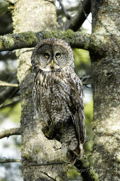 "Great Gray Owl © 2006 C. M. Neri  Whitefish Point, MI GGOWWP  <div class=""ss-paypal-button""><div class=""ss-paypal-add-to-cart-section""><div class=""ss-paypal-product-options""><h4>Mat Sizes</h4><ul><li><a href=""https://www.paypal.com/cgi-bin/webscr?cmd=_cart&amp;business=T77V5VKCW4K2U&amp;lc=US&amp;item_name=Great%20Gray%20Owl%20%C2%A9%202006%20C.%20M.%20Neri%20%20Whitefish%20Point%2C%20MI%20GGOWWP&amp;item_number=http%3A%2F%2Fwww.nightflightimages.com%2FGalleries-1%2FUpper-Peninsula-of-MI%2Fi-s3McQhT&amp;button_subtype=products&amp;no_note=0&amp;cn=Add%20special%20instructions%20to%20the%20seller%3A&amp;no_shipping=2&amp;currency_code=USD&amp;weight_unit=lbs&amp;add=1&amp;bn=PP-ShopCartBF%3Abtn_cart_SM.gif%3ANonHosted&amp;on0=Mat%20Sizes&amp;option_select0=5%20x%207&amp;option_amount0=10.00&amp;option_select1=8%20x%2010&amp;option_amount1=18.00&amp;option_select2=11%20x%2014&amp;option_amount2=28.00&amp;option_select3=card&amp;option_amount3=4.00&amp;option_index=0&amp;charset=utf-8&amp;submit=&amp;os0=5%20x%207"" target=""paypal""><span>5 x 7 $11.00 USD</span><img src=""https://www.paypalobjects.com/en_US/i/btn/btn_cart_SM.gif""></a></li><li><a href=""https://www.paypal.com/cgi-bin/webscr?cmd=_cart&amp;business=T77V5VKCW4K2U&amp;lc=US&amp;item_name=Great%20Gray%20Owl%20%C2%A9%202006%20C.%20M.%20Neri%20%20Whitefish%20Point%2C%20MI%20GGOWWP&amp;item_number=http%3A%2F%2Fwww.nightflightimages.com%2FGalleries-1%2FUpper-Peninsula-of-MI%2Fi-s3McQhT&amp;button_subtype=products&amp;no_note=0&amp;cn=Add%20special%20instructions%20to%20the%20seller%3A&amp;no_shipping=2&amp;currency_code=USD&amp;weight_unit=lbs&amp;add=1&amp;bn=PP-ShopCartBF%3Abtn_cart_SM.gif%3ANonHosted&amp;on0=Mat%20Sizes&amp;option_select0=5%20x%207&amp;option_amount0=10.00&amp;option_select1=8%20x%2010&amp;option_amount1=18.00&amp;option_select2=11%20x%2014&amp;option_amount2=28.00&amp;option_select3=card&amp;option_amount3=4.00&amp;option_index=0&amp;charset=utf-8&amp;submit=&amp;os0=8%20x%2010"" target=""paypal""><span>8 x 10 $19.00 USD</span><img src=""https://www.paypalobjects.com/en_US/i/btn/btn_cart_SM.gif""></a></li><li><a href=""https://www.paypal.com/cgi-bin/webscr?cmd=_cart&amp;business=T77V5VKCW4K2U&amp;lc=US&amp;item_name=Great%20Gray%20Owl%20%C2%A9%202006%20C.%20M.%20Neri%20%20Whitefish%20Point%2C%20MI%20GGOWWP&amp;item_number=http%3A%2F%2Fwww.nightflightimages.com%2FGalleries-1%2FUpper-Peninsula-of-MI%2Fi-s3McQhT&amp;button_subtype=products&amp;no_note=0&amp;cn=Add%20special%20instructions%20to%20the%20seller%3A&amp;no_shipping=2&amp;currency_code=USD&amp;weight_unit=lbs&amp;add=1&amp;bn=PP-ShopCartBF%3Abtn_cart_SM.gif%3ANonHosted&amp;on0=Mat%20Sizes&amp;option_select0=5%20x%207&amp;option_amount0=10.00&amp;option_select1=8%20x%2010&amp;option_amount1=18.00&amp;option_select2=11%20x%2014&amp;option_amount2=28.00&amp;option_select3=card&amp;option_amount3=4.00&amp;option_index=0&amp;charset=utf-8&amp;submit=&amp;os0=11%20x%2014"" target=""paypal""><span>11 x 14 $29.00 USD</span><img src=""https://www.paypalobjects.com/en_US/i/btn/btn_cart_SM.gif""></a></li><li><a href=""https://www.paypal.com/cgi-bin/webscr?cmd=_cart&amp;business=T77V5VKCW4K2U&amp;lc=US&amp;item_name=Great%20Gray%20Owl%20%C2%A9%202006%20C.%20M.%20Neri%20%20Whitefish%20Point%2C%20MI%20GGOWWP&amp;item_number=http%3A%2F%2Fwww.nightflightimages.com%2FGalleries-1%2FUpper-Peninsula-of-MI%2Fi-s3McQhT&amp;button_subtype=products&amp;no_note=0&amp;cn=Add%20special%20instructions%20to%20the%20seller%3A&amp;no_shipping=2&amp;currency_code=USD&amp;weight_unit=lbs&amp;add=1&amp;bn=PP-ShopCartBF%3Abtn_cart_SM.gif%3ANonHosted&amp;on0=Mat%20Sizes&amp;option_select0=5%20x%207&amp;option_amount0=10.00&amp;option_select1=8%20x%2010&amp;option_amount1=18.00&amp;option_select2=11%20x%2014&amp;option_amount2=28.00&amp;option_select3=card&amp;option_amount3=4.00&amp;option_index=0&amp;charset=utf-8&amp;submit=&amp;os0=card"" target=""paypal""><span>card $5.00 USD</span><img src=""https://www.paypalobjects.com/en_US/i/btn/btn_cart_SM.gif""></a></li></ul></div></div> <div class=""ss-paypal-view-cart-section""><a href=""https://www.paypal.com/cgi-bin/webscr?cmd=_cart&amp;business=T77V5VKCW4K2U&amp;display=1&amp;item_name=Great%20Gray%20Owl%20%C2%A9%202006%20C.%20M.%20Neri%20%20Whitefish%20Point%2C%20MI%20GGOWWP&amp;item_number=http%3A%2F%2Fwww.nightflightimages.com%2FGalleries-1%2FUpper-Peninsula-of-MI%2Fi-s3McQhT&amp;charset=utf-8&amp;submit="" target=""paypal"" class=""ss-paypal-submit-button""><img src=""https://www.paypalobjects.com/en_US/i/btn/btn_viewcart_LG.gif""></a></div></div><div class=""ss-paypal-button-end""></div>"