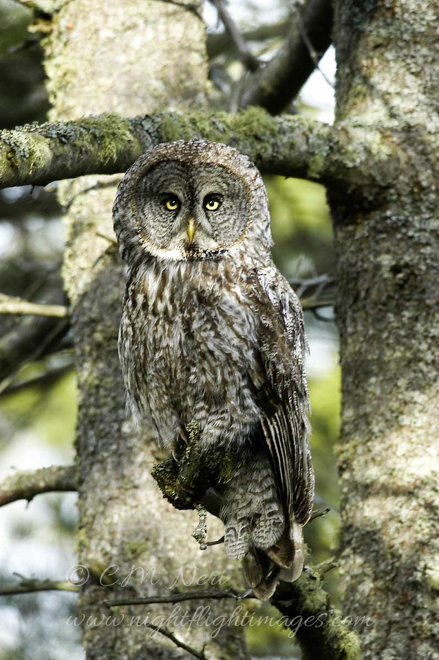 """Great Gray Owl © 2006 C. M. Neri  Whitefish Point, MI GGOWWP  <div class=""""ss-paypal-button""""><div class=""""ss-paypal-add-to-cart-section""""><div class=""""ss-paypal-product-options""""><h4>Mat Sizes</h4><ul><li><a href=""""https://www.paypal.com/cgi-bin/webscr?cmd=_cart&business=T77V5VKCW4K2U&lc=US&item_name=Great%20Gray%20Owl%20%C2%A9%202006%20C.%20M.%20Neri%20%20Whitefish%20Point%2C%20MI%20GGOWWP&item_number=http%3A%2F%2Fwww.nightflightimages.com%2FGalleries-1%2FUpper-Peninsula-of-MI%2Fi-s3McQhT&button_subtype=products&no_note=0&cn=Add%20special%20instructions%20to%20the%20seller%3A&no_shipping=2&currency_code=USD&weight_unit=lbs&add=1&bn=PP-ShopCartBF%3Abtn_cart_SM.gif%3ANonHosted&on0=Mat%20Sizes&option_select0=5%20x%207&option_amount0=10.00&option_select1=8%20x%2010&option_amount1=18.00&option_select2=11%20x%2014&option_amount2=28.00&option_select3=card&option_amount3=4.00&option_index=0&charset=utf-8&submit=&os0=5%20x%207"""" target=""""paypal""""><span>5 x 7 $11.00 USD</span><img src=""""https://www.paypalobjects.com/en_US/i/btn/btn_cart_SM.gif""""></a></li><li><a href=""""https://www.paypal.com/cgi-bin/webscr?cmd=_cart&business=T77V5VKCW4K2U&lc=US&item_name=Great%20Gray%20Owl%20%C2%A9%202006%20C.%20M.%20Neri%20%20Whitefish%20Point%2C%20MI%20GGOWWP&item_number=http%3A%2F%2Fwww.nightflightimages.com%2FGalleries-1%2FUpper-Peninsula-of-MI%2Fi-s3McQhT&button_subtype=products&no_note=0&cn=Add%20special%20instructions%20to%20the%20seller%3A&no_shipping=2&currency_code=USD&weight_unit=lbs&add=1&bn=PP-ShopCartBF%3Abtn_cart_SM.gif%3ANonHosted&on0=Mat%20Sizes&option_select0=5%20x%207&option_amount0=10.00&option_select1=8%20x%2010&option_amount1=18.00&option_select2=11%20x%2014&option_amount2=28.00&option_select3=card&option_amount3=4.00&option_index=0&charset=utf-8&submit=&os0=8%20x%2010"""" target=""""paypal""""><span>8 x 10 $19.00 USD</span><img src=""""https://www.paypalobjects.com/en_US/i/btn/btn_cart_SM.gif""""></a></li><li><a href=""""https://www.paypal.com/cgi-bin/webscr?cmd=_cart&business=T77V5VKCW4K2U&lc=US&it"""