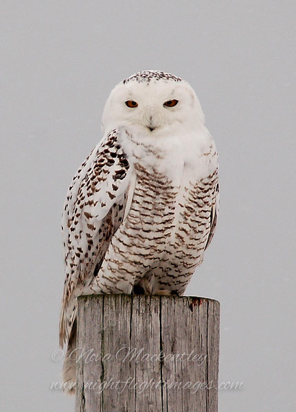 "Snowy Owl portrait © 2007 Nova Mackentley Amherst Island, ON SPP  <div class=""ss-paypal-button""><div class=""ss-paypal-add-to-cart-section""><div class=""ss-paypal-product-options""><h4>Mat Sizes</h4><ul><li><a href=""https://www.paypal.com/cgi-bin/webscr?cmd=_cart&business=T77V5VKCW4K2U&lc=US&item_name=Snowy%20Owl%20portrait%20%C2%A9%202007%20Nova%20Mackentley%20Amherst%20Island%2C%20ON%20SPP&item_number=http%3A%2F%2Fwww.nightflightimages.com%2FGalleries-1%2FOwls%2Fi-sdvZknh&button_subtype=products&no_note=0&cn=Add%20special%20instructions%20to%20the%20seller%3A&no_shipping=2&currency_code=USD&weight_unit=lbs&add=1&bn=PP-ShopCartBF%3Abtn_cart_SM.gif%3ANonHosted&on0=Mat%20Sizes&option_select0=5%20x%207&option_amount0=10.00&option_select1=8%20x%2010&option_amount1=18.00&option_select2=11%20x%2014&option_amount2=28.00&option_select3=card&option_amount3=4.00&option_index=0&charset=utf-8&submit=&os0=5%20x%207"" target=""paypal""><span>5 x 7 $11.00 USD</span><img src=""https://www.paypalobjects.com/en_US/i/btn/btn_cart_SM.gif""></a></li><li><a href=""https://www.paypal.com/cgi-bin/webscr?cmd=_cart&business=T77V5VKCW4K2U&lc=US&item_name=Snowy%20Owl%20portrait%20%C2%A9%202007%20Nova%20Mackentley%20Amherst%20Island%2C%20ON%20SPP&item_number=http%3A%2F%2Fwww.nightflightimages.com%2FGalleries-1%2FOwls%2Fi-sdvZknh&button_subtype=products&no_note=0&cn=Add%20special%20instructions%20to%20the%20seller%3A&no_shipping=2&currency_code=USD&weight_unit=lbs&add=1&bn=PP-ShopCartBF%3Abtn_cart_SM.gif%3ANonHosted&on0=Mat%20Sizes&option_select0=5%20x%207&option_amount0=10.00&option_select1=8%20x%2010&option_amount1=18.00&option_select2=11%20x%2014&option_amount2=28.00&option_select3=card&option_amount3=4.00&option_index=0&charset=utf-8&submit=&os0=8%20x%2010"" target=""paypal""><span>8 x 10 $19.00 USD</span><img src=""https://www.paypalobjects.com/en_US/i/btn/btn_cart_SM.gif""></a></li><li><a href=""https://www.paypal.com/cgi-bin/webscr?cmd=_cart&business=T77V5VKCW4K2U&lc=US&item_name=Snowy%20Owl%20portrait%20%C2%A9%202007%20Nova%20Mackentley%20Amherst%20Island%2C%20ON%20SPP&item_number=http%3A%2F%2Fwww.nightflightimages.com%2FGalleries-1%2FOwls%2Fi-sdvZknh&button_subtype=products&no_note=0&cn=Add%20special%20instructions%20to%20the%20seller%3A&no_shipping=2&currency_code=USD&weight_unit=lbs&add=1&bn=PP-ShopCartBF%3Abtn_cart_SM.gif%3ANonHosted&on0=Mat%20Sizes&option_select0=5%20x%207&option_amount0=10.00&option_select1=8%20x%2010&option_amount1=18.00&option_select2=11%20x%2014&option_amount2=28.00&option_select3=card&option_amount3=4.00&option_index=0&charset=utf-8&submit=&os0=11%20x%2014"" target=""paypal""><span>11 x 14 $29.00 USD</span><img src=""https://www.paypalobjects.com/en_US/i/btn/btn_cart_SM.gif""></a></li><li><a href=""https://www.paypal.com/cgi-bin/webscr?cmd=_cart&business=T77V5VKCW4K2U&lc=US&item_name=Snowy%20Owl%20portrait%20%C2%A9%202007%20Nova%20Mackentley%20Amherst%20Island%2C%20ON%20SPP&item_number=http%3A%2F%2Fwww.nightflightimages.com%2FGalleries-1%2FOwls%2Fi-sdvZknh&button_subtype=products&no_note=0&cn=Add%20special%20instructions%20to%20the%20seller%3A&no_shipping=2&currency_code=USD&weight_unit=lbs&add=1&bn=PP-ShopCartBF%3Abtn_cart_SM.gif%3ANonHosted&on0=Mat%20Sizes&option_select0=5%20x%207&option_amount0=10.00&option_select1=8%20x%2010&option_amount1=18.00&option_select2=11%20x%2014&option_amount2=28.00&option_select3=card&option_amount3=4.00&option_index=0&charset=utf-8&submit=&os0=card"" target=""paypal""><span>card $5.00 USD</span><img src=""https://www.paypalobjects.com/en_US/i/btn/btn_cart_SM.gif""></a></li></ul></div></div> <div class=""ss-paypal-view-cart-section""><a href=""https://www.paypal.com/cgi-bin/webscr?cmd=_cart&business=T77V5VKCW4K2U&display=1&item_name=Snowy%20Owl%20portrait%20%C2%A9%202007%20Nova%20Mackentley%20Amherst%20Island%2C%20ON%20SPP&item_number=http%3A%2F%2Fwww.nightflightimages.com%2FGalleries-1%2FOwls%2Fi-sdvZknh&charset=utf-8&submit="" target=""paypal"" class=""ss-paypal-submit-button""><img src=""https://www.paypalobjects.com/en_US/i/btn/btn_viewcart_LG.gif""></a></div></div><div class=""ss-paypal-button-end""></div>"