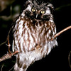 "Boreal Owl  © 2005 C. M. Neri Whitefish Point, MI BOOW STY  <div class=""ss-paypal-button""><div class=""ss-paypal-add-to-cart-section""><div class=""ss-paypal-product-options""><h4>Mat Sizes</h4><ul><li><a href=""https://www.paypal.com/cgi-bin/webscr?cmd=_cart&amp;business=T77V5VKCW4K2U&amp;lc=US&amp;item_name=Boreal%20Owl%20%20%C2%A9%202005%20C.%20M.%20Neri%20Whitefish%20Point%2C%20MI%20BOOW%20STY&amp;item_number=http%3A%2F%2Fwww.nightflightimages.com%2FGalleries-1%2FOwls%2Fi-tZQhnqF&amp;button_subtype=products&amp;no_note=0&amp;cn=Add%20special%20instructions%20to%20the%20seller%3A&amp;no_shipping=2&amp;currency_code=USD&amp;weight_unit=lbs&amp;add=1&amp;bn=PP-ShopCartBF%3Abtn_cart_SM.gif%3ANonHosted&amp;on0=Mat%20Sizes&amp;option_select0=5%20x%207&amp;option_amount0=10.00&amp;option_select1=8%20x%2010&amp;option_amount1=18.00&amp;option_select2=11%20x%2014&amp;option_amount2=28.00&amp;option_select3=card&amp;option_amount3=4.00&amp;option_index=0&amp;charset=utf-8&amp;submit=&amp;os0=5%20x%207"" target=""paypal""><span>5 x 7 $11.00 USD</span><img src=""https://www.paypalobjects.com/en_US/i/btn/btn_cart_SM.gif""></a></li><li><a href=""https://www.paypal.com/cgi-bin/webscr?cmd=_cart&amp;business=T77V5VKCW4K2U&amp;lc=US&amp;item_name=Boreal%20Owl%20%20%C2%A9%202005%20C.%20M.%20Neri%20Whitefish%20Point%2C%20MI%20BOOW%20STY&amp;item_number=http%3A%2F%2Fwww.nightflightimages.com%2FGalleries-1%2FOwls%2Fi-tZQhnqF&amp;button_subtype=products&amp;no_note=0&amp;cn=Add%20special%20instructions%20to%20the%20seller%3A&amp;no_shipping=2&amp;currency_code=USD&amp;weight_unit=lbs&amp;add=1&amp;bn=PP-ShopCartBF%3Abtn_cart_SM.gif%3ANonHosted&amp;on0=Mat%20Sizes&amp;option_select0=5%20x%207&amp;option_amount0=10.00&amp;option_select1=8%20x%2010&amp;option_amount1=18.00&amp;option_select2=11%20x%2014&amp;option_amount2=28.00&amp;option_select3=card&amp;option_amount3=4.00&amp;option_index=0&amp;charset=utf-8&amp;submit=&amp;os0=8%20x%2010"" target=""paypal""><span>8 x 10 $19.00 USD</span><img src=""https://www.paypalobjects.com/en_US/i/btn/btn_cart_SM.gif""></a></li><li><a href=""https://www.paypal.com/cgi-bin/webscr?cmd=_cart&amp;business=T77V5VKCW4K2U&amp;lc=US&amp;item_name=Boreal%20Owl%20%20%C2%A9%202005%20C.%20M.%20Neri%20Whitefish%20Point%2C%20MI%20BOOW%20STY&amp;item_number=http%3A%2F%2Fwww.nightflightimages.com%2FGalleries-1%2FOwls%2Fi-tZQhnqF&amp;button_subtype=products&amp;no_note=0&amp;cn=Add%20special%20instructions%20to%20the%20seller%3A&amp;no_shipping=2&amp;currency_code=USD&amp;weight_unit=lbs&amp;add=1&amp;bn=PP-ShopCartBF%3Abtn_cart_SM.gif%3ANonHosted&amp;on0=Mat%20Sizes&amp;option_select0=5%20x%207&amp;option_amount0=10.00&amp;option_select1=8%20x%2010&amp;option_amount1=18.00&amp;option_select2=11%20x%2014&amp;option_amount2=28.00&amp;option_select3=card&amp;option_amount3=4.00&amp;option_index=0&amp;charset=utf-8&amp;submit=&amp;os0=11%20x%2014"" target=""paypal""><span>11 x 14 $29.00 USD</span><img src=""https://www.paypalobjects.com/en_US/i/btn/btn_cart_SM.gif""></a></li><li><a href=""https://www.paypal.com/cgi-bin/webscr?cmd=_cart&amp;business=T77V5VKCW4K2U&amp;lc=US&amp;item_name=Boreal%20Owl%20%20%C2%A9%202005%20C.%20M.%20Neri%20Whitefish%20Point%2C%20MI%20BOOW%20STY&amp;item_number=http%3A%2F%2Fwww.nightflightimages.com%2FGalleries-1%2FOwls%2Fi-tZQhnqF&amp;button_subtype=products&amp;no_note=0&amp;cn=Add%20special%20instructions%20to%20the%20seller%3A&amp;no_shipping=2&amp;currency_code=USD&amp;weight_unit=lbs&amp;add=1&amp;bn=PP-ShopCartBF%3Abtn_cart_SM.gif%3ANonHosted&amp;on0=Mat%20Sizes&amp;option_select0=5%20x%207&amp;option_amount0=10.00&amp;option_select1=8%20x%2010&amp;option_amount1=18.00&amp;option_select2=11%20x%2014&amp;option_amount2=28.00&amp;option_select3=card&amp;option_amount3=4.00&amp;option_index=0&amp;charset=utf-8&amp;submit=&amp;os0=card"" target=""paypal""><span>card $5.00 USD</span><img src=""https://www.paypalobjects.com/en_US/i/btn/btn_cart_SM.gif""></a></li></ul></div></div> <div class=""ss-paypal-view-cart-section""><a href=""https://www.paypal.com/cgi-bin/webscr?cmd=_cart&amp;business=T77V5VKCW4K2U&amp;display=1&amp;item_name=Boreal%20Owl%20%20%C2%A9%202005%20C.%20M.%20Neri%20Whitefish%20Point%2C%20MI%20BOOW%20STY&amp;item_number=http%3A%2F%2Fwww.nightflightimages.com%2FGalleries-1%2FOwls%2Fi-tZQhnqF&amp;charset=utf-8&amp;submit="" target=""paypal"" class=""ss-paypal-submit-button""><img src=""https://www.paypalobjects.com/en_US/i/btn/btn_viewcart_LG.gif""></a></div></div><div class=""ss-paypal-button-end""></div>"