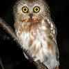Northern Saw-whet Owl © 2007 Nova Mackentley Whitefish Point, MI