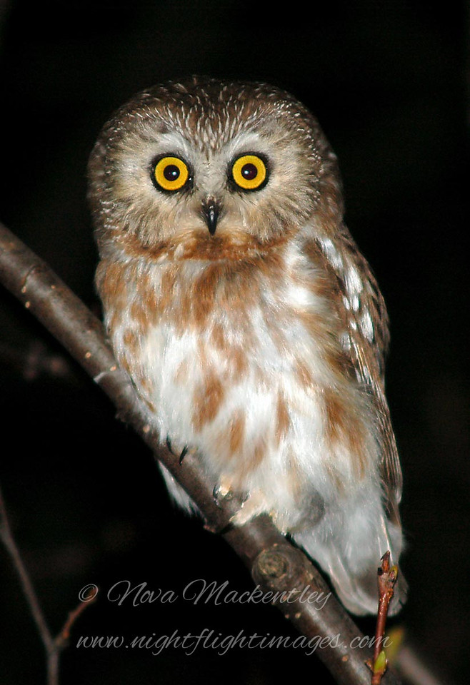 """Northern Saw-whet Owl © 2007 Nova Mackentley Whitefish Point, MI SWT  <div class=""""ss-paypal-button""""><div class=""""ss-paypal-add-to-cart-section""""><div class=""""ss-paypal-product-options""""><h4>Mat Sizes</h4><ul><li><a href=""""https://www.paypal.com/cgi-bin/webscr?cmd=_cart&business=T77V5VKCW4K2U&lc=US&item_name=Northern%20Saw-whet%20Owl%20%C2%A9%202007%20Nova%20Mackentley%20Whitefish%20Point%2C%20MI%20SWT&item_number=http%3A%2F%2Fwww.nightflightimages.com%2FGalleries-1%2FOwls%2Fi-tvw4twW&button_subtype=products&no_note=0&cn=Add%20special%20instructions%20to%20the%20seller%3A&no_shipping=2&currency_code=USD&weight_unit=lbs&add=1&bn=PP-ShopCartBF%3Abtn_cart_SM.gif%3ANonHosted&on0=Mat%20Sizes&option_select0=5%20x%207&option_amount0=10.00&option_select1=8%20x%2010&option_amount1=18.00&option_select2=11%20x%2014&option_amount2=28.00&option_select3=card&option_amount3=4.00&option_index=0&charset=utf-8&submit=&os0=5%20x%207"""" target=""""paypal""""><span>5 x 7 $11.00 USD</span><img src=""""https://www.paypalobjects.com/en_US/i/btn/btn_cart_SM.gif""""></a></li><li><a href=""""https://www.paypal.com/cgi-bin/webscr?cmd=_cart&business=T77V5VKCW4K2U&lc=US&item_name=Northern%20Saw-whet%20Owl%20%C2%A9%202007%20Nova%20Mackentley%20Whitefish%20Point%2C%20MI%20SWT&item_number=http%3A%2F%2Fwww.nightflightimages.com%2FGalleries-1%2FOwls%2Fi-tvw4twW&button_subtype=products&no_note=0&cn=Add%20special%20instructions%20to%20the%20seller%3A&no_shipping=2&currency_code=USD&weight_unit=lbs&add=1&bn=PP-ShopCartBF%3Abtn_cart_SM.gif%3ANonHosted&on0=Mat%20Sizes&option_select0=5%20x%207&option_amount0=10.00&option_select1=8%20x%2010&option_amount1=18.00&option_select2=11%20x%2014&option_amount2=28.00&option_select3=card&option_amount3=4.00&option_index=0&charset=utf-8&submit=&os0=8%20x%2010"""" target=""""paypal""""><span>8 x 10 $19.00 USD</span><img src=""""https://www.paypalobjects.com/en_US/i/btn/btn_cart_SM.gif""""></a></li><li><a href=""""https://www.paypal.com/cgi-bin/webscr?cmd=_cart&business=T77V5VKCW4K2U&lc=US&item_name=Northern%2"""
