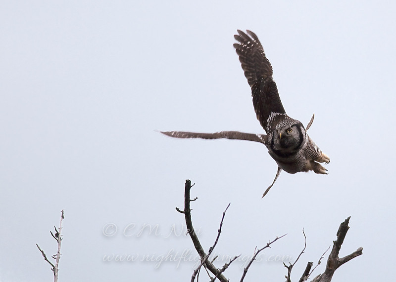 "Northern Hawk Owl  © 2009 C. M. Neri Whitefish Point, MI NHOWJUMP  <div class=""ss-paypal-button""><div class=""ss-paypal-add-to-cart-section""><div class=""ss-paypal-product-options""><h4>Mat Sizes</h4><ul><li><a href=""https://www.paypal.com/cgi-bin/webscr?cmd=_cart&amp;business=T77V5VKCW4K2U&amp;lc=US&amp;item_name=Northern%20Hawk%20Owl%20%20%C2%A9%202009%20C.%20M.%20Neri%20Whitefish%20Point%2C%20MI%20NHOWJUMP&amp;item_number=http%3A%2F%2Fwww.nightflightimages.com%2FGalleries-1%2FOwls%2Fi-vstrHHT&amp;button_subtype=products&amp;no_note=0&amp;cn=Add%20special%20instructions%20to%20the%20seller%3A&amp;no_shipping=2&amp;currency_code=USD&amp;weight_unit=lbs&amp;add=1&amp;bn=PP-ShopCartBF%3Abtn_cart_SM.gif%3ANonHosted&amp;on0=Mat%20Sizes&amp;option_select0=5%20x%207&amp;option_amount0=10.00&amp;option_select1=8%20x%2010&amp;option_amount1=18.00&amp;option_select2=11%20x%2014&amp;option_amount2=28.00&amp;option_select3=card&amp;option_amount3=4.00&amp;option_index=0&amp;charset=utf-8&amp;submit=&amp;os0=5%20x%207"" target=""paypal""><span>5 x 7 $11.00 USD</span><img src=""https://www.paypalobjects.com/en_US/i/btn/btn_cart_SM.gif""></a></li><li><a href=""https://www.paypal.com/cgi-bin/webscr?cmd=_cart&amp;business=T77V5VKCW4K2U&amp;lc=US&amp;item_name=Northern%20Hawk%20Owl%20%20%C2%A9%202009%20C.%20M.%20Neri%20Whitefish%20Point%2C%20MI%20NHOWJUMP&amp;item_number=http%3A%2F%2Fwww.nightflightimages.com%2FGalleries-1%2FOwls%2Fi-vstrHHT&amp;button_subtype=products&amp;no_note=0&amp;cn=Add%20special%20instructions%20to%20the%20seller%3A&amp;no_shipping=2&amp;currency_code=USD&amp;weight_unit=lbs&amp;add=1&amp;bn=PP-ShopCartBF%3Abtn_cart_SM.gif%3ANonHosted&amp;on0=Mat%20Sizes&amp;option_select0=5%20x%207&amp;option_amount0=10.00&amp;option_select1=8%20x%2010&amp;option_amount1=18.00&amp;option_select2=11%20x%2014&amp;option_amount2=28.00&amp;option_select3=card&amp;option_amount3=4.00&amp;option_index=0&amp;charset=utf-8&amp;submit=&amp;os0=8%20x%2010"" target=""paypal""><span>8 x 10 $19.00 USD</span><img src=""https://www.paypalobjects.com/en_US/i/btn/btn_cart_SM.gif""></a></li><li><a href=""https://www.paypal.com/cgi-bin/webscr?cmd=_cart&amp;business=T77V5VKCW4K2U&amp;lc=US&amp;item_name=Northern%20Hawk%20Owl%20%20%C2%A9%202009%20C.%20M.%20Neri%20Whitefish%20Point%2C%20MI%20NHOWJUMP&amp;item_number=http%3A%2F%2Fwww.nightflightimages.com%2FGalleries-1%2FOwls%2Fi-vstrHHT&amp;button_subtype=products&amp;no_note=0&amp;cn=Add%20special%20instructions%20to%20the%20seller%3A&amp;no_shipping=2&amp;currency_code=USD&amp;weight_unit=lbs&amp;add=1&amp;bn=PP-ShopCartBF%3Abtn_cart_SM.gif%3ANonHosted&amp;on0=Mat%20Sizes&amp;option_select0=5%20x%207&amp;option_amount0=10.00&amp;option_select1=8%20x%2010&amp;option_amount1=18.00&amp;option_select2=11%20x%2014&amp;option_amount2=28.00&amp;option_select3=card&amp;option_amount3=4.00&amp;option_index=0&amp;charset=utf-8&amp;submit=&amp;os0=11%20x%2014"" target=""paypal""><span>11 x 14 $29.00 USD</span><img src=""https://www.paypalobjects.com/en_US/i/btn/btn_cart_SM.gif""></a></li><li><a href=""https://www.paypal.com/cgi-bin/webscr?cmd=_cart&amp;business=T77V5VKCW4K2U&amp;lc=US&amp;item_name=Northern%20Hawk%20Owl%20%20%C2%A9%202009%20C.%20M.%20Neri%20Whitefish%20Point%2C%20MI%20NHOWJUMP&amp;item_number=http%3A%2F%2Fwww.nightflightimages.com%2FGalleries-1%2FOwls%2Fi-vstrHHT&amp;button_subtype=products&amp;no_note=0&amp;cn=Add%20special%20instructions%20to%20the%20seller%3A&amp;no_shipping=2&amp;currency_code=USD&amp;weight_unit=lbs&amp;add=1&amp;bn=PP-ShopCartBF%3Abtn_cart_SM.gif%3ANonHosted&amp;on0=Mat%20Sizes&amp;option_select0=5%20x%207&amp;option_amount0=10.00&amp;option_select1=8%20x%2010&amp;option_amount1=18.00&amp;option_select2=11%20x%2014&amp;option_amount2=28.00&amp;option_select3=card&amp;option_amount3=4.00&amp;option_index=0&amp;charset=utf-8&amp;submit=&amp;os0=card"" target=""paypal""><span>card $5.00 USD</span><img src=""https://www.paypalobjects.com/en_US/i/btn/btn_cart_SM.gif""></a></li></ul></div></div> <div class=""ss-paypal-view-cart-section""><a href=""https://www.paypal.com/cgi-bin/webscr?cmd=_cart&amp;business=T77V5VKCW4K2U&amp;display=1&amp;item_name=Northern%20Hawk%20Owl%20%20%C2%A9%202009%20C.%20M.%20Neri%20Whitefish%20Point%2C%20MI%20NHOWJUMP&amp;item_number=http%3A%2F%2Fwww.nightflightimages.com%2FGalleries-1%2FOwls%2Fi-vstrHHT&amp;charset=utf-8&amp;submit="" target=""paypal"" class=""ss-paypal-submit-button""><img src=""https://www.paypalobjects.com/en_US/i/btn/btn_viewcart_LG.gif""></a></div></div><div class=""ss-paypal-button-end""></div>"