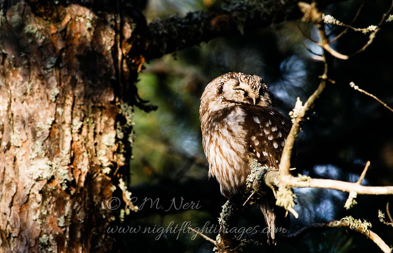 "Boreal Owl roosting © 2005 C. M. Neri  Whitefish Point, MI BOOW05  <div class=""ss-paypal-button""><div class=""ss-paypal-add-to-cart-section""><div class=""ss-paypal-product-options""><h4>Mat Sizes</h4><ul><li><a href=""https://www.paypal.com/cgi-bin/webscr?cmd=_cart&business=T77V5VKCW4K2U&lc=US&item_name=Boreal%20Owl%20roosting%20%C2%A9%202005%20C.%20M.%20Neri%20%20Whitefish%20Point%2C%20MI%20BOOW05&item_number=http%3A%2F%2Fwww.nightflightimages.com%2FGalleries-1%2FOwls%2Fi-w7KJPQ2&button_subtype=products&no_note=0&cn=Add%20special%20instructions%20to%20the%20seller%3A&no_shipping=2&currency_code=USD&weight_unit=lbs&add=1&bn=PP-ShopCartBF%3Abtn_cart_SM.gif%3ANonHosted&on0=Mat%20Sizes&option_select0=5%20x%207&option_amount0=10.00&option_select1=8%20x%2010&option_amount1=18.00&option_select2=11%20x%2014&option_amount2=28.00&option_select3=card&option_amount3=4.00&option_index=0&charset=utf-8&submit=&os0=5%20x%207"" target=""paypal""><span>5 x 7 $11.00 USD</span><img src=""https://www.paypalobjects.com/en_US/i/btn/btn_cart_SM.gif""></a></li><li><a href=""https://www.paypal.com/cgi-bin/webscr?cmd=_cart&business=T77V5VKCW4K2U&lc=US&item_name=Boreal%20Owl%20roosting%20%C2%A9%202005%20C.%20M.%20Neri%20%20Whitefish%20Point%2C%20MI%20BOOW05&item_number=http%3A%2F%2Fwww.nightflightimages.com%2FGalleries-1%2FOwls%2Fi-w7KJPQ2&button_subtype=products&no_note=0&cn=Add%20special%20instructions%20to%20the%20seller%3A&no_shipping=2&currency_code=USD&weight_unit=lbs&add=1&bn=PP-ShopCartBF%3Abtn_cart_SM.gif%3ANonHosted&on0=Mat%20Sizes&option_select0=5%20x%207&option_amount0=10.00&option_select1=8%20x%2010&option_amount1=18.00&option_select2=11%20x%2014&option_amount2=28.00&option_select3=card&option_amount3=4.00&option_index=0&charset=utf-8&submit=&os0=8%20x%2010"" target=""paypal""><span>8 x 10 $19.00 USD</span><img src=""https://www.paypalobjects.com/en_US/i/btn/btn_cart_SM.gif""></a></li><li><a href=""https://www.paypal.com/cgi-bin/webscr?cmd=_cart&business=T77V5VKCW4K2U&lc=US&item_name=Boreal%20Owl%20roosting%20%C2%A9%202005%20C.%20M.%20Neri%20%20Whitefish%20Point%2C%20MI%20BOOW05&item_number=http%3A%2F%2Fwww.nightflightimages.com%2FGalleries-1%2FOwls%2Fi-w7KJPQ2&button_subtype=products&no_note=0&cn=Add%20special%20instructions%20to%20the%20seller%3A&no_shipping=2&currency_code=USD&weight_unit=lbs&add=1&bn=PP-ShopCartBF%3Abtn_cart_SM.gif%3ANonHosted&on0=Mat%20Sizes&option_select0=5%20x%207&option_amount0=10.00&option_select1=8%20x%2010&option_amount1=18.00&option_select2=11%20x%2014&option_amount2=28.00&option_select3=card&option_amount3=4.00&option_index=0&charset=utf-8&submit=&os0=11%20x%2014"" target=""paypal""><span>11 x 14 $29.00 USD</span><img src=""https://www.paypalobjects.com/en_US/i/btn/btn_cart_SM.gif""></a></li><li><a href=""https://www.paypal.com/cgi-bin/webscr?cmd=_cart&business=T77V5VKCW4K2U&lc=US&item_name=Boreal%20Owl%20roosting%20%C2%A9%202005%20C.%20M.%20Neri%20%20Whitefish%20Point%2C%20MI%20BOOW05&item_number=http%3A%2F%2Fwww.nightflightimages.com%2FGalleries-1%2FOwls%2Fi-w7KJPQ2&button_subtype=products&no_note=0&cn=Add%20special%20instructions%20to%20the%20seller%3A&no_shipping=2&currency_code=USD&weight_unit=lbs&add=1&bn=PP-ShopCartBF%3Abtn_cart_SM.gif%3ANonHosted&on0=Mat%20Sizes&option_select0=5%20x%207&option_amount0=10.00&option_select1=8%20x%2010&option_amount1=18.00&option_select2=11%20x%2014&option_amount2=28.00&option_select3=card&option_amount3=4.00&option_index=0&charset=utf-8&submit=&os0=card"" target=""paypal""><span>card $5.00 USD</span><img src=""https://www.paypalobjects.com/en_US/i/btn/btn_cart_SM.gif""></a></li></ul></div></div> <div class=""ss-paypal-view-cart-section""><a href=""https://www.paypal.com/cgi-bin/webscr?cmd=_cart&business=T77V5VKCW4K2U&display=1&item_name=Boreal%20Owl%20roosting%20%C2%A9%202005%20C.%20M.%20Neri%20%20Whitefish%20Point%2C%20MI%20BOOW05&item_number=http%3A%2F%2Fwww.nightflightimages.com%2FGalleries-1%2FOwls%2Fi-w7KJPQ2&charset=utf-8&submit="" target=""paypal"" class=""ss-paypal-submit-button""><img src=""https://www.paypalobjects.com/en_US/i/btn/btn_viewcart_LG.gif""></a></div></div><div class=""ss-paypal-button-end""></div>"