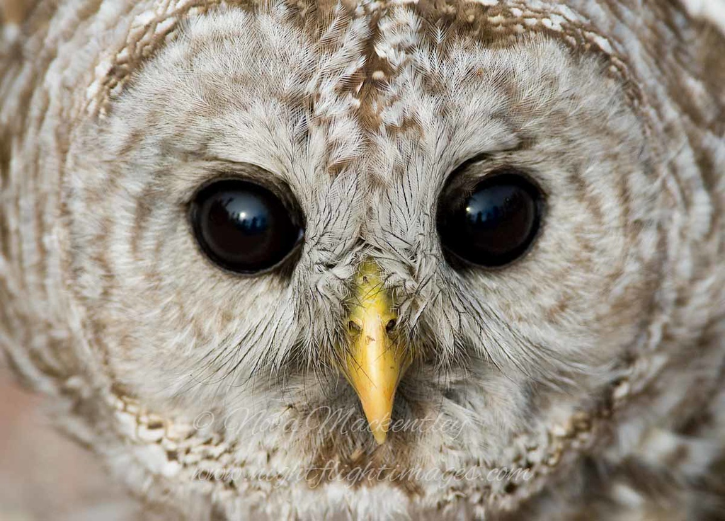 """Barred Owl © 2008 Nova Mackentley Whitefish Point, MI BDF  <div class=""""ss-paypal-button""""><div class=""""ss-paypal-add-to-cart-section""""><div class=""""ss-paypal-product-options""""><h4>Mat Sizes</h4><ul><li><a href=""""https://www.paypal.com/cgi-bin/webscr?cmd=_cart&business=T77V5VKCW4K2U&lc=US&item_name=Barred%20Owl%20%C2%A9%202008%20Nova%20Mackentley%20Whitefish%20Point%2C%20MI%20BDF&item_number=http%3A%2F%2Fwww.nightflightimages.com%2FGalleries-1%2FUpper-Peninsula-of-MI%2Fi-wQWwdrj&button_subtype=products&no_note=0&cn=Add%20special%20instructions%20to%20the%20seller%3A&no_shipping=2&currency_code=USD&weight_unit=lbs&add=1&bn=PP-ShopCartBF%3Abtn_cart_SM.gif%3ANonHosted&on0=Mat%20Sizes&option_select0=5%20x%207&option_amount0=10.00&option_select1=8%20x%2010&option_amount1=18.00&option_select2=11%20x%2014&option_amount2=28.00&option_select3=card&option_amount3=4.00&option_index=0&charset=utf-8&submit=&os0=5%20x%207"""" target=""""paypal""""><span>5 x 7 $11.00 USD</span><img src=""""https://www.paypalobjects.com/en_US/i/btn/btn_cart_SM.gif""""></a></li><li><a href=""""https://www.paypal.com/cgi-bin/webscr?cmd=_cart&business=T77V5VKCW4K2U&lc=US&item_name=Barred%20Owl%20%C2%A9%202008%20Nova%20Mackentley%20Whitefish%20Point%2C%20MI%20BDF&item_number=http%3A%2F%2Fwww.nightflightimages.com%2FGalleries-1%2FUpper-Peninsula-of-MI%2Fi-wQWwdrj&button_subtype=products&no_note=0&cn=Add%20special%20instructions%20to%20the%20seller%3A&no_shipping=2&currency_code=USD&weight_unit=lbs&add=1&bn=PP-ShopCartBF%3Abtn_cart_SM.gif%3ANonHosted&on0=Mat%20Sizes&option_select0=5%20x%207&option_amount0=10.00&option_select1=8%20x%2010&option_amount1=18.00&option_select2=11%20x%2014&option_amount2=28.00&option_select3=card&option_amount3=4.00&option_index=0&charset=utf-8&submit=&os0=8%20x%2010"""" target=""""paypal""""><span>8 x 10 $19.00 USD</span><img src=""""https://www.paypalobjects.com/en_US/i/btn/btn_cart_SM.gif""""></a></li><li><a href=""""https://www.paypal.com/cgi-bin/webscr?cmd=_cart&business=T77V5VKCW4K2U&lc=US&item_name=Barred%20Owl%"""