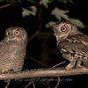 "Eastern Screech Owls adult & chick © 2010 Nova Mackentley  Adirondack Mtns, NY ESS  <div class=""ss-paypal-button""><div class=""ss-paypal-add-to-cart-section""><div class=""ss-paypal-product-options""><h4>Mat Sizes</h4><ul><li><a href=""https://www.paypal.com/cgi-bin/webscr?cmd=_cart&business=T77V5VKCW4K2U&lc=US&item_name=Eastern%20Screech%20Owls%20adult%20%26amp%3B%20chick%20%C2%A9%202010%20Nova%20Mackentley%20%20Adirondack%20Mtns%2C%20NY%20ESS&item_number=http%3A%2F%2Fwww.nightflightimages.com%2FGalleries-1%2FOwls%2Fi-x5jDvn2&button_subtype=products&no_note=0&cn=Add%20special%20instructions%20to%20the%20seller%3A&no_shipping=2&currency_code=USD&weight_unit=lbs&add=1&bn=PP-ShopCartBF%3Abtn_cart_SM.gif%3ANonHosted&on0=Mat%20Sizes&option_select0=5%20x%207&option_amount0=10.00&option_select1=8%20x%2010&option_amount1=18.00&option_select2=11%20x%2014&option_amount2=28.00&option_select3=card&option_amount3=4.00&option_index=0&charset=utf-8&submit=&os0=5%20x%207"" target=""paypal""><span>5 x 7 $11.00 USD</span><img src=""https://www.paypalobjects.com/en_US/i/btn/btn_cart_SM.gif""></a></li><li><a href=""https://www.paypal.com/cgi-bin/webscr?cmd=_cart&business=T77V5VKCW4K2U&lc=US&item_name=Eastern%20Screech%20Owls%20adult%20%26amp%3B%20chick%20%C2%A9%202010%20Nova%20Mackentley%20%20Adirondack%20Mtns%2C%20NY%20ESS&item_number=http%3A%2F%2Fwww.nightflightimages.com%2FGalleries-1%2FOwls%2Fi-x5jDvn2&button_subtype=products&no_note=0&cn=Add%20special%20instructions%20to%20the%20seller%3A&no_shipping=2&currency_code=USD&weight_unit=lbs&add=1&bn=PP-ShopCartBF%3Abtn_cart_SM.gif%3ANonHosted&on0=Mat%20Sizes&option_select0=5%20x%207&option_amount0=10.00&option_select1=8%20x%2010&option_amount1=18.00&option_select2=11%20x%2014&option_amount2=28.00&option_select3=card&option_amount3=4.00&option_index=0&charset=utf-8&submit=&os0=8%20x%2010"" target=""paypal""><span>8 x 10 $19.00 USD</span><img src=""https://www.paypalobjects.com/en_US/i/btn/btn_cart_SM.gif""></a></li><li><a href=""https://www.paypal.com/cgi-bin/webscr?cmd=_cart&business=T77V5VKCW4K2U&lc=US&item_name=Eastern%20Screech%20Owls%20adult%20%26amp%3B%20chick%20%C2%A9%202010%20Nova%20Mackentley%20%20Adirondack%20Mtns%2C%20NY%20ESS&item_number=http%3A%2F%2Fwww.nightflightimages.com%2FGalleries-1%2FOwls%2Fi-x5jDvn2&button_subtype=products&no_note=0&cn=Add%20special%20instructions%20to%20the%20seller%3A&no_shipping=2&currency_code=USD&weight_unit=lbs&add=1&bn=PP-ShopCartBF%3Abtn_cart_SM.gif%3ANonHosted&on0=Mat%20Sizes&option_select0=5%20x%207&option_amount0=10.00&option_select1=8%20x%2010&option_amount1=18.00&option_select2=11%20x%2014&option_amount2=28.00&option_select3=card&option_amount3=4.00&option_index=0&charset=utf-8&submit=&os0=11%20x%2014"" target=""paypal""><span>11 x 14 $29.00 USD</span><img src=""https://www.paypalobjects.com/en_US/i/btn/btn_cart_SM.gif""></a></li><li><a href=""https://www.paypal.com/cgi-bin/webscr?cmd=_cart&business=T77V5VKCW4K2U&lc=US&item_name=Eastern%20Screech%20Owls%20adult%20%26amp%3B%20chick%20%C2%A9%202010%20Nova%20Mackentley%20%20Adirondack%20Mtns%2C%20NY%20ESS&item_number=http%3A%2F%2Fwww.nightflightimages.com%2FGalleries-1%2FOwls%2Fi-x5jDvn2&button_subtype=products&no_note=0&cn=Add%20special%20instructions%20to%20the%20seller%3A&no_shipping=2&currency_code=USD&weight_unit=lbs&add=1&bn=PP-ShopCartBF%3Abtn_cart_SM.gif%3ANonHosted&on0=Mat%20Sizes&option_select0=5%20x%207&option_amount0=10.00&option_select1=8%20x%2010&option_amount1=18.00&option_select2=11%20x%2014&option_amount2=28.00&option_select3=card&option_amount3=4.00&option_index=0&charset=utf-8&submit=&os0=card"" target=""paypal""><span>card $5.00 USD</span><img src=""https://www.paypalobjects.com/en_US/i/btn/btn_cart_SM.gif""></a></li></ul></div></div> <div class=""ss-paypal-view-cart-section""><a href=""https://www.paypal.com/cgi-bin/webscr?cmd=_cart&business=T77V5VKCW4K2U&display=1&item_name=Eastern%20Screech%20Owls%20adult%20%26amp%3B%20chick%20%C2%A9%202010%20Nova%20Mackentley%20%20Adirondack%20Mtns%2C%20NY%20ESS&item_number=http%3A%2F%2Fwww.nightflightimages.com%2FGalleries-1%2FOwls%2Fi-x5jDvn2&charset=utf-8&submit="" target=""paypal"" class=""ss-paypal-submit-button""><img src=""https://www.paypalobjects.com/en_US/i/btn/btn_viewcart_LG.gif""></a></div></div><div class=""ss-paypal-button-end""></div>"