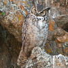 "Great Horned Owl © 2016 Chris M Neri Estes Park, CO GHEP  <div class=""ss-paypal-button""><div class=""ss-paypal-add-to-cart-section""><div class=""ss-paypal-product-options""><h4>Mat Sizes</h4><ul><li><a href=""https://www.paypal.com/cgi-bin/webscr?cmd=_cart&business=T77V5VKCW4K2U&lc=US&item_name=Great%20Horned%20Owl%20%C2%A9%202016%20Chris%20M%20Neri%20Estes%20Park%2C%20CO%20GHEP&item_number=http%3A%2F%2Fwww.nightflightimages.com%2FGalleries-1%2FNew%2Fi-xZwqrgG&button_subtype=products&no_note=0&cn=Add%20special%20instructions%20to%20the%20seller%3A&no_shipping=2&currency_code=USD&weight_unit=lbs&add=1&bn=PP-ShopCartBF%3Abtn_cart_SM.gif%3ANonHosted&on0=Mat%20Sizes&option_select0=5%20x%207&option_amount0=12.00&option_select1=8%20x%2010&option_amount1=19.00&option_select2=11%20x%2014&option_amount2=29.00&option_select3=card&option_amount3=5.00&option_index=0&charset=utf-8&submit=&os0=5%20x%207"" target=""paypal""><span>5 x 7 $12.00 USD</span><img src=""https://www.paypalobjects.com/en_US/i/btn/btn_cart_SM.gif""></a></li><li><a href=""https://www.paypal.com/cgi-bin/webscr?cmd=_cart&business=T77V5VKCW4K2U&lc=US&item_name=Great%20Horned%20Owl%20%C2%A9%202016%20Chris%20M%20Neri%20Estes%20Park%2C%20CO%20GHEP&item_number=http%3A%2F%2Fwww.nightflightimages.com%2FGalleries-1%2FNew%2Fi-xZwqrgG&button_subtype=products&no_note=0&cn=Add%20special%20instructions%20to%20the%20seller%3A&no_shipping=2&currency_code=USD&weight_unit=lbs&add=1&bn=PP-ShopCartBF%3Abtn_cart_SM.gif%3ANonHosted&on0=Mat%20Sizes&option_select0=5%20x%207&option_amount0=12.00&option_select1=8%20x%2010&option_amount1=19.00&option_select2=11%20x%2014&option_amount2=29.00&option_select3=card&option_amount3=5.00&option_index=0&charset=utf-8&submit=&os0=8%20x%2010"" target=""paypal""><span>8 x 10 $19.00 USD</span><img src=""https://www.paypalobjects.com/en_US/i/btn/btn_cart_SM.gif""></a></li><li><a href=""https://www.paypal.com/cgi-bin/webscr?cmd=_cart&business=T77V5VKCW4K2U&lc=US&item_name=Great%20Horned%20Owl%20%C2%A9%202016%20Chris%20M%20Neri%20Estes%20Park%2C%20CO%20GHEP&item_number=http%3A%2F%2Fwww.nightflightimages.com%2FGalleries-1%2FNew%2Fi-xZwqrgG&button_subtype=products&no_note=0&cn=Add%20special%20instructions%20to%20the%20seller%3A&no_shipping=2&currency_code=USD&weight_unit=lbs&add=1&bn=PP-ShopCartBF%3Abtn_cart_SM.gif%3ANonHosted&on0=Mat%20Sizes&option_select0=5%20x%207&option_amount0=12.00&option_select1=8%20x%2010&option_amount1=19.00&option_select2=11%20x%2014&option_amount2=29.00&option_select3=card&option_amount3=5.00&option_index=0&charset=utf-8&submit=&os0=11%20x%2014"" target=""paypal""><span>11 x 14 $29.00 USD</span><img src=""https://www.paypalobjects.com/en_US/i/btn/btn_cart_SM.gif""></a></li><li><a href=""https://www.paypal.com/cgi-bin/webscr?cmd=_cart&business=T77V5VKCW4K2U&lc=US&item_name=Great%20Horned%20Owl%20%C2%A9%202016%20Chris%20M%20Neri%20Estes%20Park%2C%20CO%20GHEP&item_number=http%3A%2F%2Fwww.nightflightimages.com%2FGalleries-1%2FNew%2Fi-xZwqrgG&button_subtype=products&no_note=0&cn=Add%20special%20instructions%20to%20the%20seller%3A&no_shipping=2&currency_code=USD&weight_unit=lbs&add=1&bn=PP-ShopCartBF%3Abtn_cart_SM.gif%3ANonHosted&on0=Mat%20Sizes&option_select0=5%20x%207&option_amount0=12.00&option_select1=8%20x%2010&option_amount1=19.00&option_select2=11%20x%2014&option_amount2=29.00&option_select3=card&option_amount3=5.00&option_index=0&charset=utf-8&submit=&os0=card"" target=""paypal""><span>card $5.00 USD</span><img src=""https://www.paypalobjects.com/en_US/i/btn/btn_cart_SM.gif""></a></li></ul></div></div> <div class=""ss-paypal-view-cart-section""><a href=""https://www.paypal.com/cgi-bin/webscr?cmd=_cart&business=T77V5VKCW4K2U&display=1&item_name=Great%20Horned%20Owl%20%C2%A9%202016%20Chris%20M%20Neri%20Estes%20Park%2C%20CO%20GHEP&item_number=http%3A%2F%2Fwww.nightflightimages.com%2FGalleries-1%2FNew%2Fi-xZwqrgG&charset=utf-8&submit="" target=""paypal"" class=""ss-paypal-submit-button""><img src=""https://www.paypalobjects.com/en_US/i/btn/btn_viewcart_LG.gif""></a></div></div><div class=""ss-paypal-button-end""></div>"
