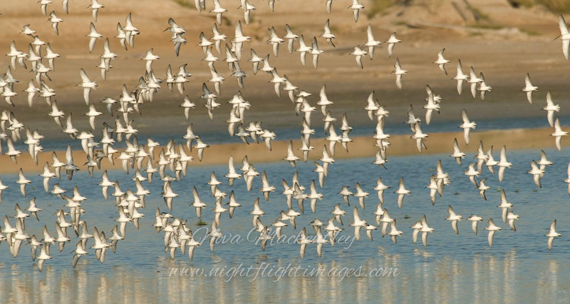 "Shorebirds in flight 2 © 2008 Nova Mackentley Laguna Atascosa NWR, TX SIF2  <div class=""ss-paypal-button""><div class=""ss-paypal-add-to-cart-section""><div class=""ss-paypal-product-options""><h4>Mat Sizes</h4><ul><li><a href=""https://www.paypal.com/cgi-bin/webscr?cmd=_cart&amp;business=T77V5VKCW4K2U&amp;lc=US&amp;item_name=Shorebirds%20in%20flight%202%20%C2%A9%202008%20Nova%20Mackentley%20Laguna%20Atascosa%20NWR%2C%20TX%20SIF2&amp;item_number=http%3A%2F%2Fwww.nightflightimages.com%2FGalleries-1%2FShore%2Fi-3jPZMrb&amp;button_subtype=products&amp;no_note=0&amp;cn=Add%20special%20instructions%20to%20the%20seller%3A&amp;no_shipping=2&amp;currency_code=USD&amp;weight_unit=lbs&amp;add=1&amp;bn=PP-ShopCartBF%3Abtn_cart_SM.gif%3ANonHosted&amp;on0=Mat%20Sizes&amp;option_select0=5%20x%207&amp;option_amount0=10.00&amp;option_select1=8%20x%2010&amp;option_amount1=18.00&amp;option_select2=11%20x%2014&amp;option_amount2=28.00&amp;option_select3=card&amp;option_amount3=4.00&amp;option_index=0&amp;charset=utf-8&amp;submit=&amp;os0=5%20x%207"" target=""paypal""><span>5 x 7 $11.00 USD</span><img src=""https://www.paypalobjects.com/en_US/i/btn/btn_cart_SM.gif""></a></li><li><a href=""https://www.paypal.com/cgi-bin/webscr?cmd=_cart&amp;business=T77V5VKCW4K2U&amp;lc=US&amp;item_name=Shorebirds%20in%20flight%202%20%C2%A9%202008%20Nova%20Mackentley%20Laguna%20Atascosa%20NWR%2C%20TX%20SIF2&amp;item_number=http%3A%2F%2Fwww.nightflightimages.com%2FGalleries-1%2FShore%2Fi-3jPZMrb&amp;button_subtype=products&amp;no_note=0&amp;cn=Add%20special%20instructions%20to%20the%20seller%3A&amp;no_shipping=2&amp;currency_code=USD&amp;weight_unit=lbs&amp;add=1&amp;bn=PP-ShopCartBF%3Abtn_cart_SM.gif%3ANonHosted&amp;on0=Mat%20Sizes&amp;option_select0=5%20x%207&amp;option_amount0=10.00&amp;option_select1=8%20x%2010&amp;option_amount1=18.00&amp;option_select2=11%20x%2014&amp;option_amount2=28.00&amp;option_select3=card&amp;option_amount3=4.00&amp;option_index=0&amp;charset=utf-8&amp;submit=&amp;os0=8%20x%2010"" target=""paypal""><span>8 x 10 $19.00 USD</span><img src=""https://www.paypalobjects.com/en_US/i/btn/btn_cart_SM.gif""></a></li><li><a href=""https://www.paypal.com/cgi-bin/webscr?cmd=_cart&amp;business=T77V5VKCW4K2U&amp;lc=US&amp;item_name=Shorebirds%20in%20flight%202%20%C2%A9%202008%20Nova%20Mackentley%20Laguna%20Atascosa%20NWR%2C%20TX%20SIF2&amp;item_number=http%3A%2F%2Fwww.nightflightimages.com%2FGalleries-1%2FShore%2Fi-3jPZMrb&amp;button_subtype=products&amp;no_note=0&amp;cn=Add%20special%20instructions%20to%20the%20seller%3A&amp;no_shipping=2&amp;currency_code=USD&amp;weight_unit=lbs&amp;add=1&amp;bn=PP-ShopCartBF%3Abtn_cart_SM.gif%3ANonHosted&amp;on0=Mat%20Sizes&amp;option_select0=5%20x%207&amp;option_amount0=10.00&amp;option_select1=8%20x%2010&amp;option_amount1=18.00&amp;option_select2=11%20x%2014&amp;option_amount2=28.00&amp;option_select3=card&amp;option_amount3=4.00&amp;option_index=0&amp;charset=utf-8&amp;submit=&amp;os0=11%20x%2014"" target=""paypal""><span>11 x 14 $29.00 USD</span><img src=""https://www.paypalobjects.com/en_US/i/btn/btn_cart_SM.gif""></a></li><li><a href=""https://www.paypal.com/cgi-bin/webscr?cmd=_cart&amp;business=T77V5VKCW4K2U&amp;lc=US&amp;item_name=Shorebirds%20in%20flight%202%20%C2%A9%202008%20Nova%20Mackentley%20Laguna%20Atascosa%20NWR%2C%20TX%20SIF2&amp;item_number=http%3A%2F%2Fwww.nightflightimages.com%2FGalleries-1%2FShore%2Fi-3jPZMrb&amp;button_subtype=products&amp;no_note=0&amp;cn=Add%20special%20instructions%20to%20the%20seller%3A&amp;no_shipping=2&amp;currency_code=USD&amp;weight_unit=lbs&amp;add=1&amp;bn=PP-ShopCartBF%3Abtn_cart_SM.gif%3ANonHosted&amp;on0=Mat%20Sizes&amp;option_select0=5%20x%207&amp;option_amount0=10.00&amp;option_select1=8%20x%2010&amp;option_amount1=18.00&amp;option_select2=11%20x%2014&amp;option_amount2=28.00&amp;option_select3=card&amp;option_amount3=4.00&amp;option_index=0&amp;charset=utf-8&amp;submit=&amp;os0=card"" target=""paypal""><span>card $5.00 USD</span><img src=""https://www.paypalobjects.com/en_US/i/btn/btn_cart_SM.gif""></a></li></ul></div></div> <div class=""ss-paypal-view-cart-section""><a href=""https://www.paypal.com/cgi-bin/webscr?cmd=_cart&amp;business=T77V5VKCW4K2U&amp;display=1&amp;item_name=Shorebirds%20in%20flight%202%20%C2%A9%202008%20Nova%20Mackentley%20Laguna%20Atascosa%20NWR%2C%20TX%20SIF2&amp;item_number=http%3A%2F%2Fwww.nightflightimages.com%2FGalleries-1%2FShore%2Fi-3jPZMrb&amp;charset=utf-8&amp;submit="" target=""paypal"" class=""ss-paypal-submit-button""><img src=""https://www.paypalobjects.com/en_US/i/btn/btn_viewcart_LG.gif""></a></div></div><div class=""ss-paypal-button-end""></div>"