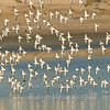 """Shorebirds in flight 2 © 2008 Nova Mackentley Laguna Atascosa NWR, TX SIF2  <div class=""""ss-paypal-button""""><div class=""""ss-paypal-add-to-cart-section""""><div class=""""ss-paypal-product-options""""><h4>Mat Sizes</h4><ul><li><a href=""""https://www.paypal.com/cgi-bin/webscr?cmd=_cart&business=T77V5VKCW4K2U&lc=US&item_name=Shorebirds%20in%20flight%202%20%C2%A9%202008%20Nova%20Mackentley%20Laguna%20Atascosa%20NWR%2C%20TX%20SIF2&item_number=http%3A%2F%2Fwww.nightflightimages.com%2FGalleries-1%2FShore%2Fi-3jPZMrb&button_subtype=products&no_note=0&cn=Add%20special%20instructions%20to%20the%20seller%3A&no_shipping=2&currency_code=USD&weight_unit=lbs&add=1&bn=PP-ShopCartBF%3Abtn_cart_SM.gif%3ANonHosted&on0=Mat%20Sizes&option_select0=5%20x%207&option_amount0=10.00&option_select1=8%20x%2010&option_amount1=18.00&option_select2=11%20x%2014&option_amount2=28.00&option_select3=card&option_amount3=4.00&option_index=0&charset=utf-8&submit=&os0=5%20x%207"""" target=""""paypal""""><span>5 x 7 $11.00 USD</span><img src=""""https://www.paypalobjects.com/en_US/i/btn/btn_cart_SM.gif""""></a></li><li><a href=""""https://www.paypal.com/cgi-bin/webscr?cmd=_cart&business=T77V5VKCW4K2U&lc=US&item_name=Shorebirds%20in%20flight%202%20%C2%A9%202008%20Nova%20Mackentley%20Laguna%20Atascosa%20NWR%2C%20TX%20SIF2&item_number=http%3A%2F%2Fwww.nightflightimages.com%2FGalleries-1%2FShore%2Fi-3jPZMrb&button_subtype=products&no_note=0&cn=Add%20special%20instructions%20to%20the%20seller%3A&no_shipping=2&currency_code=USD&weight_unit=lbs&add=1&bn=PP-ShopCartBF%3Abtn_cart_SM.gif%3ANonHosted&on0=Mat%20Sizes&option_select0=5%20x%207&option_amount0=10.00&option_select1=8%20x%2010&option_amount1=18.00&option_select2=11%20x%2014&option_amount2=28.00&option_select3=card&option_amount3=4.00&option_index=0&charset=utf-8&submit=&os0=8%20x%2010"""" target=""""paypal""""><span>8 x 10 $19.00 USD</span><img src=""""https://www.paypalobjects.com/en_US/i/btn/btn_cart_SM.gif""""></a></li><li><a href=""""https://www.paypal.com/cgi-bin/webscr?cmd=_cart&business=T77V5VKCW4K2"""
