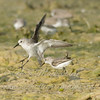 "Western Sandpipers © 2008 Nova Mackentley Laguna Atascosa NWR, TX WES  <div class=""ss-paypal-button""><div class=""ss-paypal-add-to-cart-section""><div class=""ss-paypal-product-options""><h4>Mat Sizes</h4><ul><li><a href=""https://www.paypal.com/cgi-bin/webscr?cmd=_cart&business=T77V5VKCW4K2U&lc=US&item_name=Western%20Sandpipers%20%C2%A9%202008%20Nova%20Mackentley%20Laguna%20Atascosa%20NWR%2C%20TX%20WES&item_number=http%3A%2F%2Fwww.nightflightimages.com%2FGalleries-1%2FShore%2Fi-56Lfnrz&button_subtype=products&no_note=0&cn=Add%20special%20instructions%20to%20the%20seller%3A&no_shipping=2&currency_code=USD&weight_unit=lbs&add=1&bn=PP-ShopCartBF%3Abtn_cart_SM.gif%3ANonHosted&on0=Mat%20Sizes&option_select0=5%20x%207&option_amount0=10.00&option_select1=8%20x%2010&option_amount1=18.00&option_select2=11%20x%2014&option_amount2=28.00&option_select3=card&option_amount3=4.00&option_index=0&charset=utf-8&submit=&os0=5%20x%207"" target=""paypal""><span>5 x 7 $11.00 USD</span><img src=""https://www.paypalobjects.com/en_US/i/btn/btn_cart_SM.gif""></a></li><li><a href=""https://www.paypal.com/cgi-bin/webscr?cmd=_cart&business=T77V5VKCW4K2U&lc=US&item_name=Western%20Sandpipers%20%C2%A9%202008%20Nova%20Mackentley%20Laguna%20Atascosa%20NWR%2C%20TX%20WES&item_number=http%3A%2F%2Fwww.nightflightimages.com%2FGalleries-1%2FShore%2Fi-56Lfnrz&button_subtype=products&no_note=0&cn=Add%20special%20instructions%20to%20the%20seller%3A&no_shipping=2&currency_code=USD&weight_unit=lbs&add=1&bn=PP-ShopCartBF%3Abtn_cart_SM.gif%3ANonHosted&on0=Mat%20Sizes&option_select0=5%20x%207&option_amount0=10.00&option_select1=8%20x%2010&option_amount1=18.00&option_select2=11%20x%2014&option_amount2=28.00&option_select3=card&option_amount3=4.00&option_index=0&charset=utf-8&submit=&os0=8%20x%2010"" target=""paypal""><span>8 x 10 $19.00 USD</span><img src=""https://www.paypalobjects.com/en_US/i/btn/btn_cart_SM.gif""></a></li><li><a href=""https://www.paypal.com/cgi-bin/webscr?cmd=_cart&business=T77V5VKCW4K2U&lc=US&item_name=Western%20Sandpipers%20%C2%A9%202008%20Nova%20Mackentley%20Laguna%20Atascosa%20NWR%2C%20TX%20WES&item_number=http%3A%2F%2Fwww.nightflightimages.com%2FGalleries-1%2FShore%2Fi-56Lfnrz&button_subtype=products&no_note=0&cn=Add%20special%20instructions%20to%20the%20seller%3A&no_shipping=2&currency_code=USD&weight_unit=lbs&add=1&bn=PP-ShopCartBF%3Abtn_cart_SM.gif%3ANonHosted&on0=Mat%20Sizes&option_select0=5%20x%207&option_amount0=10.00&option_select1=8%20x%2010&option_amount1=18.00&option_select2=11%20x%2014&option_amount2=28.00&option_select3=card&option_amount3=4.00&option_index=0&charset=utf-8&submit=&os0=11%20x%2014"" target=""paypal""><span>11 x 14 $29.00 USD</span><img src=""https://www.paypalobjects.com/en_US/i/btn/btn_cart_SM.gif""></a></li><li><a href=""https://www.paypal.com/cgi-bin/webscr?cmd=_cart&business=T77V5VKCW4K2U&lc=US&item_name=Western%20Sandpipers%20%C2%A9%202008%20Nova%20Mackentley%20Laguna%20Atascosa%20NWR%2C%20TX%20WES&item_number=http%3A%2F%2Fwww.nightflightimages.com%2FGalleries-1%2FShore%2Fi-56Lfnrz&button_subtype=products&no_note=0&cn=Add%20special%20instructions%20to%20the%20seller%3A&no_shipping=2&currency_code=USD&weight_unit=lbs&add=1&bn=PP-ShopCartBF%3Abtn_cart_SM.gif%3ANonHosted&on0=Mat%20Sizes&option_select0=5%20x%207&option_amount0=10.00&option_select1=8%20x%2010&option_amount1=18.00&option_select2=11%20x%2014&option_amount2=28.00&option_select3=card&option_amount3=4.00&option_index=0&charset=utf-8&submit=&os0=card"" target=""paypal""><span>card $5.00 USD</span><img src=""https://www.paypalobjects.com/en_US/i/btn/btn_cart_SM.gif""></a></li></ul></div></div> <div class=""ss-paypal-view-cart-section""><a href=""https://www.paypal.com/cgi-bin/webscr?cmd=_cart&business=T77V5VKCW4K2U&display=1&item_name=Western%20Sandpipers%20%C2%A9%202008%20Nova%20Mackentley%20Laguna%20Atascosa%20NWR%2C%20TX%20WES&item_number=http%3A%2F%2Fwww.nightflightimages.com%2FGalleries-1%2FShore%2Fi-56Lfnrz&charset=utf-8&submit="" target=""paypal"" class=""ss-paypal-submit-button""><img src=""https://www.paypalobjects.com/en_US/i/btn/btn_viewcart_LG.gif""></a></div></div><div class=""ss-paypal-button-end""></div>"