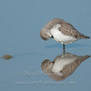 "Western Sandpiper © 2008 Nova Mackentley Laguna Atascosa NWR, TX WES  <div class=""ss-paypal-button""><div class=""ss-paypal-add-to-cart-section""><div class=""ss-paypal-product-options""><h4>Mat Sizes</h4><ul><li><a href=""https://www.paypal.com/cgi-bin/webscr?cmd=_cart&business=T77V5VKCW4K2U&lc=US&item_name=Western%20Sandpiper%20%C2%A9%202008%20Nova%20Mackentley%20Laguna%20Atascosa%20NWR%2C%20TX%20WES&item_number=http%3A%2F%2Fwww.nightflightimages.com%2FGalleries-1%2FShore%2Fi-6Rc2SGq&button_subtype=products&no_note=0&cn=Add%20special%20instructions%20to%20the%20seller%3A&no_shipping=2&currency_code=USD&weight_unit=lbs&add=1&bn=PP-ShopCartBF%3Abtn_cart_SM.gif%3ANonHosted&on0=Mat%20Sizes&option_select0=5%20x%207&option_amount0=10.00&option_select1=8%20x%2010&option_amount1=18.00&option_select2=11%20x%2014&option_amount2=28.00&option_select3=card&option_amount3=4.00&option_index=0&charset=utf-8&submit=&os0=5%20x%207"" target=""paypal""><span>5 x 7 $11.00 USD</span><img src=""https://www.paypalobjects.com/en_US/i/btn/btn_cart_SM.gif""></a></li><li><a href=""https://www.paypal.com/cgi-bin/webscr?cmd=_cart&business=T77V5VKCW4K2U&lc=US&item_name=Western%20Sandpiper%20%C2%A9%202008%20Nova%20Mackentley%20Laguna%20Atascosa%20NWR%2C%20TX%20WES&item_number=http%3A%2F%2Fwww.nightflightimages.com%2FGalleries-1%2FShore%2Fi-6Rc2SGq&button_subtype=products&no_note=0&cn=Add%20special%20instructions%20to%20the%20seller%3A&no_shipping=2&currency_code=USD&weight_unit=lbs&add=1&bn=PP-ShopCartBF%3Abtn_cart_SM.gif%3ANonHosted&on0=Mat%20Sizes&option_select0=5%20x%207&option_amount0=10.00&option_select1=8%20x%2010&option_amount1=18.00&option_select2=11%20x%2014&option_amount2=28.00&option_select3=card&option_amount3=4.00&option_index=0&charset=utf-8&submit=&os0=8%20x%2010"" target=""paypal""><span>8 x 10 $19.00 USD</span><img src=""https://www.paypalobjects.com/en_US/i/btn/btn_cart_SM.gif""></a></li><li><a href=""https://www.paypal.com/cgi-bin/webscr?cmd=_cart&business=T77V5VKCW4K2U&lc=US&item_name=Western%20Sandpiper%20%C2%A9%202008%20Nova%20Mackentley%20Laguna%20Atascosa%20NWR%2C%20TX%20WES&item_number=http%3A%2F%2Fwww.nightflightimages.com%2FGalleries-1%2FShore%2Fi-6Rc2SGq&button_subtype=products&no_note=0&cn=Add%20special%20instructions%20to%20the%20seller%3A&no_shipping=2&currency_code=USD&weight_unit=lbs&add=1&bn=PP-ShopCartBF%3Abtn_cart_SM.gif%3ANonHosted&on0=Mat%20Sizes&option_select0=5%20x%207&option_amount0=10.00&option_select1=8%20x%2010&option_amount1=18.00&option_select2=11%20x%2014&option_amount2=28.00&option_select3=card&option_amount3=4.00&option_index=0&charset=utf-8&submit=&os0=11%20x%2014"" target=""paypal""><span>11 x 14 $29.00 USD</span><img src=""https://www.paypalobjects.com/en_US/i/btn/btn_cart_SM.gif""></a></li><li><a href=""https://www.paypal.com/cgi-bin/webscr?cmd=_cart&business=T77V5VKCW4K2U&lc=US&item_name=Western%20Sandpiper%20%C2%A9%202008%20Nova%20Mackentley%20Laguna%20Atascosa%20NWR%2C%20TX%20WES&item_number=http%3A%2F%2Fwww.nightflightimages.com%2FGalleries-1%2FShore%2Fi-6Rc2SGq&button_subtype=products&no_note=0&cn=Add%20special%20instructions%20to%20the%20seller%3A&no_shipping=2&currency_code=USD&weight_unit=lbs&add=1&bn=PP-ShopCartBF%3Abtn_cart_SM.gif%3ANonHosted&on0=Mat%20Sizes&option_select0=5%20x%207&option_amount0=10.00&option_select1=8%20x%2010&option_amount1=18.00&option_select2=11%20x%2014&option_amount2=28.00&option_select3=card&option_amount3=4.00&option_index=0&charset=utf-8&submit=&os0=card"" target=""paypal""><span>card $5.00 USD</span><img src=""https://www.paypalobjects.com/en_US/i/btn/btn_cart_SM.gif""></a></li></ul></div></div> <div class=""ss-paypal-view-cart-section""><a href=""https://www.paypal.com/cgi-bin/webscr?cmd=_cart&business=T77V5VKCW4K2U&display=1&item_name=Western%20Sandpiper%20%C2%A9%202008%20Nova%20Mackentley%20Laguna%20Atascosa%20NWR%2C%20TX%20WES&item_number=http%3A%2F%2Fwww.nightflightimages.com%2FGalleries-1%2FShore%2Fi-6Rc2SGq&charset=utf-8&submit="" target=""paypal"" class=""ss-paypal-submit-button""><img src=""https://www.paypalobjects.com/en_US/i/btn/btn_viewcart_LG.gif""></a></div></div><div class=""ss-paypal-button-end""></div>"