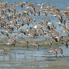 """Shorebirds in flight 1 © 2008 Nova Mackentley Laguna Atascosa NWR, TX SIF1  <div class=""""ss-paypal-button""""><div class=""""ss-paypal-add-to-cart-section""""><div class=""""ss-paypal-product-options""""><h4>Mat Sizes</h4><ul><li><a href=""""https://www.paypal.com/cgi-bin/webscr?cmd=_cart&business=T77V5VKCW4K2U&lc=US&item_name=Shorebirds%20in%20flight%201%20%C2%A9%202008%20Nova%20Mackentley%20Laguna%20Atascosa%20NWR%2C%20TX%20SIF1&item_number=http%3A%2F%2Fwww.nightflightimages.com%2FGalleries-1%2FShore%2Fi-6Rt64HS&button_subtype=products&no_note=0&cn=Add%20special%20instructions%20to%20the%20seller%3A&no_shipping=2&currency_code=USD&weight_unit=lbs&add=1&bn=PP-ShopCartBF%3Abtn_cart_SM.gif%3ANonHosted&on0=Mat%20Sizes&option_select0=5%20x%207&option_amount0=10.00&option_select1=8%20x%2010&option_amount1=18.00&option_select2=11%20x%2014&option_amount2=28.00&option_select3=card&option_amount3=4.00&option_index=0&charset=utf-8&submit=&os0=5%20x%207"""" target=""""paypal""""><span>5 x 7 $11.00 USD</span><img src=""""https://www.paypalobjects.com/en_US/i/btn/btn_cart_SM.gif""""></a></li><li><a href=""""https://www.paypal.com/cgi-bin/webscr?cmd=_cart&business=T77V5VKCW4K2U&lc=US&item_name=Shorebirds%20in%20flight%201%20%C2%A9%202008%20Nova%20Mackentley%20Laguna%20Atascosa%20NWR%2C%20TX%20SIF1&item_number=http%3A%2F%2Fwww.nightflightimages.com%2FGalleries-1%2FShore%2Fi-6Rt64HS&button_subtype=products&no_note=0&cn=Add%20special%20instructions%20to%20the%20seller%3A&no_shipping=2&currency_code=USD&weight_unit=lbs&add=1&bn=PP-ShopCartBF%3Abtn_cart_SM.gif%3ANonHosted&on0=Mat%20Sizes&option_select0=5%20x%207&option_amount0=10.00&option_select1=8%20x%2010&option_amount1=18.00&option_select2=11%20x%2014&option_amount2=28.00&option_select3=card&option_amount3=4.00&option_index=0&charset=utf-8&submit=&os0=8%20x%2010"""" target=""""paypal""""><span>8 x 10 $19.00 USD</span><img src=""""https://www.paypalobjects.com/en_US/i/btn/btn_cart_SM.gif""""></a></li><li><a href=""""https://www.paypal.com/cgi-bin/webscr?cmd=_cart&business=T77V5VKCW4K2"""