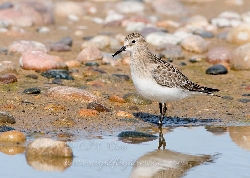 "Baird's Sandpiper © 2008 C. M. Neri.  Whitefish Point, MI BASAWP08  <div class=""ss-paypal-button""><div class=""ss-paypal-add-to-cart-section""><div class=""ss-paypal-product-options""><h4>Mat Sizes</h4><ul><li><a href=""https://www.paypal.com/cgi-bin/webscr?cmd=_cart&amp;business=T77V5VKCW4K2U&amp;lc=US&amp;item_name=Baird's%20Sandpiper%20%C2%A9%202008%20C.%20M.%20Neri.%20%20Whitefish%20Point%2C%20MI%20BASAWP08&amp;item_number=http%3A%2F%2Fwww.nightflightimages.com%2FGalleries-1%2FShore%2Fi-8FngscK&amp;button_subtype=products&amp;no_note=0&amp;cn=Add%20special%20instructions%20to%20the%20seller%3A&amp;no_shipping=2&amp;currency_code=USD&amp;weight_unit=lbs&amp;add=1&amp;bn=PP-ShopCartBF%3Abtn_cart_SM.gif%3ANonHosted&amp;on0=Mat%20Sizes&amp;option_select0=5%20x%207&amp;option_amount0=10.00&amp;option_select1=8%20x%2010&amp;option_amount1=18.00&amp;option_select2=11%20x%2014&amp;option_amount2=28.00&amp;option_select3=card&amp;option_amount3=4.00&amp;option_index=0&amp;charset=utf-8&amp;submit=&amp;os0=5%20x%207"" target=""paypal""><span>5 x 7 $11.00 USD</span><img src=""https://www.paypalobjects.com/en_US/i/btn/btn_cart_SM.gif""></a></li><li><a href=""https://www.paypal.com/cgi-bin/webscr?cmd=_cart&amp;business=T77V5VKCW4K2U&amp;lc=US&amp;item_name=Baird's%20Sandpiper%20%C2%A9%202008%20C.%20M.%20Neri.%20%20Whitefish%20Point%2C%20MI%20BASAWP08&amp;item_number=http%3A%2F%2Fwww.nightflightimages.com%2FGalleries-1%2FShore%2Fi-8FngscK&amp;button_subtype=products&amp;no_note=0&amp;cn=Add%20special%20instructions%20to%20the%20seller%3A&amp;no_shipping=2&amp;currency_code=USD&amp;weight_unit=lbs&amp;add=1&amp;bn=PP-ShopCartBF%3Abtn_cart_SM.gif%3ANonHosted&amp;on0=Mat%20Sizes&amp;option_select0=5%20x%207&amp;option_amount0=10.00&amp;option_select1=8%20x%2010&amp;option_amount1=18.00&amp;option_select2=11%20x%2014&amp;option_amount2=28.00&amp;option_select3=card&amp;option_amount3=4.00&amp;option_index=0&amp;charset=utf-8&amp;submit=&amp;os0=8%20x%2010"" target=""paypal""><span>8 x 10 $19.00 USD</span><img src=""https://www.paypalobjects.com/en_US/i/btn/btn_cart_SM.gif""></a></li><li><a href=""https://www.paypal.com/cgi-bin/webscr?cmd=_cart&amp;business=T77V5VKCW4K2U&amp;lc=US&amp;item_name=Baird's%20Sandpiper%20%C2%A9%202008%20C.%20M.%20Neri.%20%20Whitefish%20Point%2C%20MI%20BASAWP08&amp;item_number=http%3A%2F%2Fwww.nightflightimages.com%2FGalleries-1%2FShore%2Fi-8FngscK&amp;button_subtype=products&amp;no_note=0&amp;cn=Add%20special%20instructions%20to%20the%20seller%3A&amp;no_shipping=2&amp;currency_code=USD&amp;weight_unit=lbs&amp;add=1&amp;bn=PP-ShopCartBF%3Abtn_cart_SM.gif%3ANonHosted&amp;on0=Mat%20Sizes&amp;option_select0=5%20x%207&amp;option_amount0=10.00&amp;option_select1=8%20x%2010&amp;option_amount1=18.00&amp;option_select2=11%20x%2014&amp;option_amount2=28.00&amp;option_select3=card&amp;option_amount3=4.00&amp;option_index=0&amp;charset=utf-8&amp;submit=&amp;os0=11%20x%2014"" target=""paypal""><span>11 x 14 $29.00 USD</span><img src=""https://www.paypalobjects.com/en_US/i/btn/btn_cart_SM.gif""></a></li><li><a href=""https://www.paypal.com/cgi-bin/webscr?cmd=_cart&amp;business=T77V5VKCW4K2U&amp;lc=US&amp;item_name=Baird's%20Sandpiper%20%C2%A9%202008%20C.%20M.%20Neri.%20%20Whitefish%20Point%2C%20MI%20BASAWP08&amp;item_number=http%3A%2F%2Fwww.nightflightimages.com%2FGalleries-1%2FShore%2Fi-8FngscK&amp;button_subtype=products&amp;no_note=0&amp;cn=Add%20special%20instructions%20to%20the%20seller%3A&amp;no_shipping=2&amp;currency_code=USD&amp;weight_unit=lbs&amp;add=1&amp;bn=PP-ShopCartBF%3Abtn_cart_SM.gif%3ANonHosted&amp;on0=Mat%20Sizes&amp;option_select0=5%20x%207&amp;option_amount0=10.00&amp;option_select1=8%20x%2010&amp;option_amount1=18.00&amp;option_select2=11%20x%2014&amp;option_amount2=28.00&amp;option_select3=card&amp;option_amount3=4.00&amp;option_index=0&amp;charset=utf-8&amp;submit=&amp;os0=card"" target=""paypal""><span>card $5.00 USD</span><img src=""https://www.paypalobjects.com/en_US/i/btn/btn_cart_SM.gif""></a></li></ul></div></div> <div class=""ss-paypal-view-cart-section""><a href=""https://www.paypal.com/cgi-bin/webscr?cmd=_cart&amp;business=T77V5VKCW4K2U&amp;display=1&amp;item_name=Baird's%20Sandpiper%20%C2%A9%202008%20C.%20M.%20Neri.%20%20Whitefish%20Point%2C%20MI%20BASAWP08&amp;item_number=http%3A%2F%2Fwww.nightflightimages.com%2FGalleries-1%2FShore%2Fi-8FngscK&amp;charset=utf-8&amp;submit="" target=""paypal"" class=""ss-paypal-submit-button""><img src=""https://www.paypalobjects.com/en_US/i/btn/btn_viewcart_LG.gif""></a></div></div><div class=""ss-paypal-button-end""></div>"