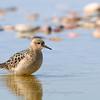 """Buff-breasted Sandpiper © 2009 C. M. Neri. Whitefish Point, MI PIPLAW09  <div class=""""ss-paypal-button""""><div class=""""ss-paypal-add-to-cart-section""""><div class=""""ss-paypal-product-options""""><h4>Mat Sizes</h4><ul><li><a href=""""https://www.paypal.com/cgi-bin/webscr?cmd=_cart&amp;business=T77V5VKCW4K2U&amp;lc=US&amp;item_name=Buff-breasted%20Sandpiper%20%C2%A9%202009%20C.%20M.%20Neri.%20Whitefish%20Point%2C%20MI%20PIPLAW09&amp;item_number=http%3A%2F%2Fwww.nightflightimages.com%2FGalleries-1%2FShore%2Fi-8WGzpfj&amp;button_subtype=products&amp;no_note=0&amp;cn=Add%20special%20instructions%20to%20the%20seller%3A&amp;no_shipping=2&amp;currency_code=USD&amp;weight_unit=lbs&amp;add=1&amp;bn=PP-ShopCartBF%3Abtn_cart_SM.gif%3ANonHosted&amp;on0=Mat%20Sizes&amp;option_select0=5%20x%207&amp;option_amount0=10.00&amp;option_select1=8%20x%2010&amp;option_amount1=18.00&amp;option_select2=11%20x%2014&amp;option_amount2=28.00&amp;option_select3=card&amp;option_amount3=4.00&amp;option_index=0&amp;charset=utf-8&amp;submit=&amp;os0=5%20x%207"""" target=""""paypal""""><span>5 x 7 $11.00 USD</span><img src=""""https://www.paypalobjects.com/en_US/i/btn/btn_cart_SM.gif""""></a></li><li><a href=""""https://www.paypal.com/cgi-bin/webscr?cmd=_cart&amp;business=T77V5VKCW4K2U&amp;lc=US&amp;item_name=Buff-breasted%20Sandpiper%20%C2%A9%202009%20C.%20M.%20Neri.%20Whitefish%20Point%2C%20MI%20PIPLAW09&amp;item_number=http%3A%2F%2Fwww.nightflightimages.com%2FGalleries-1%2FShore%2Fi-8WGzpfj&amp;button_subtype=products&amp;no_note=0&amp;cn=Add%20special%20instructions%20to%20the%20seller%3A&amp;no_shipping=2&amp;currency_code=USD&amp;weight_unit=lbs&amp;add=1&amp;bn=PP-ShopCartBF%3Abtn_cart_SM.gif%3ANonHosted&amp;on0=Mat%20Sizes&amp;option_select0=5%20x%207&amp;option_amount0=10.00&amp;option_select1=8%20x%2010&amp;option_amount1=18.00&amp;option_select2=11%20x%2014&amp;option_amount2=28.00&amp;option_select3=card&amp;option_amount3=4.00&amp;option_index=0&amp;charset=utf-8&amp;submit=&amp;os0=8%20x%2010"""" target=""""paypal""""><span>8"""