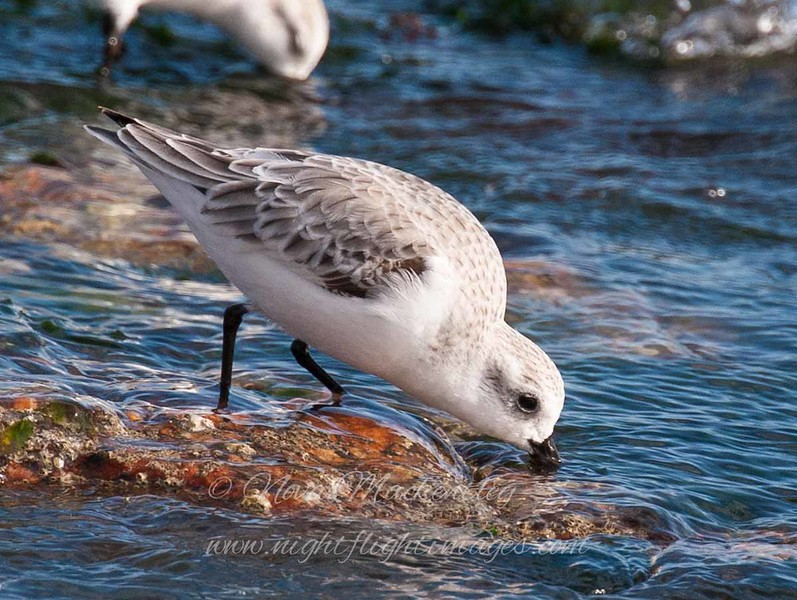 "Sanderling © 2009 Nova Mackentley Boca Chica Beach, TX SAN  <div class=""ss-paypal-button""><div class=""ss-paypal-add-to-cart-section""><div class=""ss-paypal-product-options""><h4>Mat Sizes</h4><ul><li><a href=""https://www.paypal.com/cgi-bin/webscr?cmd=_cart&amp;business=T77V5VKCW4K2U&amp;lc=US&amp;item_name=Sanderling%20%C2%A9%202009%20Nova%20Mackentley%20Boca%20Chica%20Beach%2C%20TX%20SAN&amp;item_number=http%3A%2F%2Fwww.nightflightimages.com%2FGalleries-1%2FShore%2Fi-B9D5Njs&amp;button_subtype=products&amp;no_note=0&amp;cn=Add%20special%20instructions%20to%20the%20seller%3A&amp;no_shipping=2&amp;currency_code=USD&amp;weight_unit=lbs&amp;add=1&amp;bn=PP-ShopCartBF%3Abtn_cart_SM.gif%3ANonHosted&amp;on0=Mat%20Sizes&amp;option_select0=5%20x%207&amp;option_amount0=10.00&amp;option_select1=8%20x%2010&amp;option_amount1=18.00&amp;option_select2=11%20x%2014&amp;option_amount2=28.00&amp;option_select3=card&amp;option_amount3=4.00&amp;option_index=0&amp;charset=utf-8&amp;submit=&amp;os0=5%20x%207"" target=""paypal""><span>5 x 7 $11.00 USD</span><img src=""https://www.paypalobjects.com/en_US/i/btn/btn_cart_SM.gif""></a></li><li><a href=""https://www.paypal.com/cgi-bin/webscr?cmd=_cart&amp;business=T77V5VKCW4K2U&amp;lc=US&amp;item_name=Sanderling%20%C2%A9%202009%20Nova%20Mackentley%20Boca%20Chica%20Beach%2C%20TX%20SAN&amp;item_number=http%3A%2F%2Fwww.nightflightimages.com%2FGalleries-1%2FShore%2Fi-B9D5Njs&amp;button_subtype=products&amp;no_note=0&amp;cn=Add%20special%20instructions%20to%20the%20seller%3A&amp;no_shipping=2&amp;currency_code=USD&amp;weight_unit=lbs&amp;add=1&amp;bn=PP-ShopCartBF%3Abtn_cart_SM.gif%3ANonHosted&amp;on0=Mat%20Sizes&amp;option_select0=5%20x%207&amp;option_amount0=10.00&amp;option_select1=8%20x%2010&amp;option_amount1=18.00&amp;option_select2=11%20x%2014&amp;option_amount2=28.00&amp;option_select3=card&amp;option_amount3=4.00&amp;option_index=0&amp;charset=utf-8&amp;submit=&amp;os0=8%20x%2010"" target=""paypal""><span>8 x 10 $19.00 USD</span><img src=""https://www.paypalobjects.com/en_US/i/btn/btn_cart_SM.gif""></a></li><li><a href=""https://www.paypal.com/cgi-bin/webscr?cmd=_cart&amp;business=T77V5VKCW4K2U&amp;lc=US&amp;item_name=Sanderling%20%C2%A9%202009%20Nova%20Mackentley%20Boca%20Chica%20Beach%2C%20TX%20SAN&amp;item_number=http%3A%2F%2Fwww.nightflightimages.com%2FGalleries-1%2FShore%2Fi-B9D5Njs&amp;button_subtype=products&amp;no_note=0&amp;cn=Add%20special%20instructions%20to%20the%20seller%3A&amp;no_shipping=2&amp;currency_code=USD&amp;weight_unit=lbs&amp;add=1&amp;bn=PP-ShopCartBF%3Abtn_cart_SM.gif%3ANonHosted&amp;on0=Mat%20Sizes&amp;option_select0=5%20x%207&amp;option_amount0=10.00&amp;option_select1=8%20x%2010&amp;option_amount1=18.00&amp;option_select2=11%20x%2014&amp;option_amount2=28.00&amp;option_select3=card&amp;option_amount3=4.00&amp;option_index=0&amp;charset=utf-8&amp;submit=&amp;os0=11%20x%2014"" target=""paypal""><span>11 x 14 $29.00 USD</span><img src=""https://www.paypalobjects.com/en_US/i/btn/btn_cart_SM.gif""></a></li><li><a href=""https://www.paypal.com/cgi-bin/webscr?cmd=_cart&amp;business=T77V5VKCW4K2U&amp;lc=US&amp;item_name=Sanderling%20%C2%A9%202009%20Nova%20Mackentley%20Boca%20Chica%20Beach%2C%20TX%20SAN&amp;item_number=http%3A%2F%2Fwww.nightflightimages.com%2FGalleries-1%2FShore%2Fi-B9D5Njs&amp;button_subtype=products&amp;no_note=0&amp;cn=Add%20special%20instructions%20to%20the%20seller%3A&amp;no_shipping=2&amp;currency_code=USD&amp;weight_unit=lbs&amp;add=1&amp;bn=PP-ShopCartBF%3Abtn_cart_SM.gif%3ANonHosted&amp;on0=Mat%20Sizes&amp;option_select0=5%20x%207&amp;option_amount0=10.00&amp;option_select1=8%20x%2010&amp;option_amount1=18.00&amp;option_select2=11%20x%2014&amp;option_amount2=28.00&amp;option_select3=card&amp;option_amount3=4.00&amp;option_index=0&amp;charset=utf-8&amp;submit=&amp;os0=card"" target=""paypal""><span>card $5.00 USD</span><img src=""https://www.paypalobjects.com/en_US/i/btn/btn_cart_SM.gif""></a></li></ul></div></div> <div class=""ss-paypal-view-cart-section""><a href=""https://www.paypal.com/cgi-bin/webscr?cmd=_cart&amp;business=T77V5VKCW4K2U&amp;display=1&amp;item_name=Sanderling%20%C2%A9%202009%20Nova%20Mackentley%20Boca%20Chica%20Beach%2C%20TX%20SAN&amp;item_number=http%3A%2F%2Fwww.nightflightimages.com%2FGalleries-1%2FShore%2Fi-B9D5Njs&amp;charset=utf-8&amp;submit="" target=""paypal"" class=""ss-paypal-submit-button""><img src=""https://www.paypalobjects.com/en_US/i/btn/btn_viewcart_LG.gif""></a></div></div><div class=""ss-paypal-button-end""></div>"
