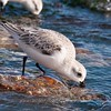 "Sanderling © 2009 Nova Mackentley Boca Chica Beach, TX SAN  <div class=""ss-paypal-button""><div class=""ss-paypal-add-to-cart-section""><div class=""ss-paypal-product-options""><h4>Mat Sizes</h4><ul><li><a href=""https://www.paypal.com/cgi-bin/webscr?cmd=_cart&business=T77V5VKCW4K2U&lc=US&item_name=Sanderling%20%C2%A9%202009%20Nova%20Mackentley%20Boca%20Chica%20Beach%2C%20TX%20SAN&item_number=http%3A%2F%2Fwww.nightflightimages.com%2FGalleries-1%2FShore%2Fi-B9D5Njs&button_subtype=products&no_note=0&cn=Add%20special%20instructions%20to%20the%20seller%3A&no_shipping=2&currency_code=USD&weight_unit=lbs&add=1&bn=PP-ShopCartBF%3Abtn_cart_SM.gif%3ANonHosted&on0=Mat%20Sizes&option_select0=5%20x%207&option_amount0=10.00&option_select1=8%20x%2010&option_amount1=18.00&option_select2=11%20x%2014&option_amount2=28.00&option_select3=card&option_amount3=4.00&option_index=0&charset=utf-8&submit=&os0=5%20x%207"" target=""paypal""><span>5 x 7 $11.00 USD</span><img src=""https://www.paypalobjects.com/en_US/i/btn/btn_cart_SM.gif""></a></li><li><a href=""https://www.paypal.com/cgi-bin/webscr?cmd=_cart&business=T77V5VKCW4K2U&lc=US&item_name=Sanderling%20%C2%A9%202009%20Nova%20Mackentley%20Boca%20Chica%20Beach%2C%20TX%20SAN&item_number=http%3A%2F%2Fwww.nightflightimages.com%2FGalleries-1%2FShore%2Fi-B9D5Njs&button_subtype=products&no_note=0&cn=Add%20special%20instructions%20to%20the%20seller%3A&no_shipping=2&currency_code=USD&weight_unit=lbs&add=1&bn=PP-ShopCartBF%3Abtn_cart_SM.gif%3ANonHosted&on0=Mat%20Sizes&option_select0=5%20x%207&option_amount0=10.00&option_select1=8%20x%2010&option_amount1=18.00&option_select2=11%20x%2014&option_amount2=28.00&option_select3=card&option_amount3=4.00&option_index=0&charset=utf-8&submit=&os0=8%20x%2010"" target=""paypal""><span>8 x 10 $19.00 USD</span><img src=""https://www.paypalobjects.com/en_US/i/btn/btn_cart_SM.gif""></a></li><li><a href=""https://www.paypal.com/cgi-bin/webscr?cmd=_cart&business=T77V5VKCW4K2U&lc=US&item_name=Sanderling%20%C2%A9%202009%20Nova%20Mackentley%20Boca%20Chica%20Beach%2C%20TX%20SAN&item_number=http%3A%2F%2Fwww.nightflightimages.com%2FGalleries-1%2FShore%2Fi-B9D5Njs&button_subtype=products&no_note=0&cn=Add%20special%20instructions%20to%20the%20seller%3A&no_shipping=2&currency_code=USD&weight_unit=lbs&add=1&bn=PP-ShopCartBF%3Abtn_cart_SM.gif%3ANonHosted&on0=Mat%20Sizes&option_select0=5%20x%207&option_amount0=10.00&option_select1=8%20x%2010&option_amount1=18.00&option_select2=11%20x%2014&option_amount2=28.00&option_select3=card&option_amount3=4.00&option_index=0&charset=utf-8&submit=&os0=11%20x%2014"" target=""paypal""><span>11 x 14 $29.00 USD</span><img src=""https://www.paypalobjects.com/en_US/i/btn/btn_cart_SM.gif""></a></li><li><a href=""https://www.paypal.com/cgi-bin/webscr?cmd=_cart&business=T77V5VKCW4K2U&lc=US&item_name=Sanderling%20%C2%A9%202009%20Nova%20Mackentley%20Boca%20Chica%20Beach%2C%20TX%20SAN&item_number=http%3A%2F%2Fwww.nightflightimages.com%2FGalleries-1%2FShore%2Fi-B9D5Njs&button_subtype=products&no_note=0&cn=Add%20special%20instructions%20to%20the%20seller%3A&no_shipping=2&currency_code=USD&weight_unit=lbs&add=1&bn=PP-ShopCartBF%3Abtn_cart_SM.gif%3ANonHosted&on0=Mat%20Sizes&option_select0=5%20x%207&option_amount0=10.00&option_select1=8%20x%2010&option_amount1=18.00&option_select2=11%20x%2014&option_amount2=28.00&option_select3=card&option_amount3=4.00&option_index=0&charset=utf-8&submit=&os0=card"" target=""paypal""><span>card $5.00 USD</span><img src=""https://www.paypalobjects.com/en_US/i/btn/btn_cart_SM.gif""></a></li></ul></div></div> <div class=""ss-paypal-view-cart-section""><a href=""https://www.paypal.com/cgi-bin/webscr?cmd=_cart&business=T77V5VKCW4K2U&display=1&item_name=Sanderling%20%C2%A9%202009%20Nova%20Mackentley%20Boca%20Chica%20Beach%2C%20TX%20SAN&item_number=http%3A%2F%2Fwww.nightflightimages.com%2FGalleries-1%2FShore%2Fi-B9D5Njs&charset=utf-8&submit="" target=""paypal"" class=""ss-paypal-submit-button""><img src=""https://www.paypalobjects.com/en_US/i/btn/btn_viewcart_LG.gif""></a></div></div><div class=""ss-paypal-button-end""></div>"