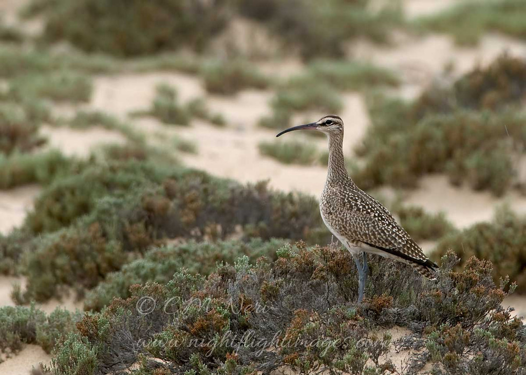 """Whimbrel © 2009 C. M. Neri.  Whitefish Point, MI WHIMWP  <div class=""""ss-paypal-button""""><div class=""""ss-paypal-add-to-cart-section""""><div class=""""ss-paypal-product-options""""><h4>Mat Sizes</h4><ul><li><a href=""""https://www.paypal.com/cgi-bin/webscr?cmd=_cart&business=T77V5VKCW4K2U&lc=US&item_name=Whimbrel%20%C2%A9%202009%20C.%20M.%20Neri.%20%20Whitefish%20Point%2C%20MI%20WHIMWP&item_number=http%3A%2F%2Fwww.nightflightimages.com%2FGalleries-1%2FShore%2Fi-BLsjQFH&button_subtype=products&no_note=0&cn=Add%20special%20instructions%20to%20the%20seller%3A&no_shipping=2&currency_code=USD&weight_unit=lbs&add=1&bn=PP-ShopCartBF%3Abtn_cart_SM.gif%3ANonHosted&on0=Mat%20Sizes&option_select0=5%20x%207&option_amount0=10.00&option_select1=8%20x%2010&option_amount1=18.00&option_select2=11%20x%2014&option_amount2=28.00&option_select3=card&option_amount3=4.00&option_index=0&charset=utf-8&submit=&os0=5%20x%207"""" target=""""paypal""""><span>5 x 7 $11.00 USD</span><img src=""""https://www.paypalobjects.com/en_US/i/btn/btn_cart_SM.gif""""></a></li><li><a href=""""https://www.paypal.com/cgi-bin/webscr?cmd=_cart&business=T77V5VKCW4K2U&lc=US&item_name=Whimbrel%20%C2%A9%202009%20C.%20M.%20Neri.%20%20Whitefish%20Point%2C%20MI%20WHIMWP&item_number=http%3A%2F%2Fwww.nightflightimages.com%2FGalleries-1%2FShore%2Fi-BLsjQFH&button_subtype=products&no_note=0&cn=Add%20special%20instructions%20to%20the%20seller%3A&no_shipping=2&currency_code=USD&weight_unit=lbs&add=1&bn=PP-ShopCartBF%3Abtn_cart_SM.gif%3ANonHosted&on0=Mat%20Sizes&option_select0=5%20x%207&option_amount0=10.00&option_select1=8%20x%2010&option_amount1=18.00&option_select2=11%20x%2014&option_amount2=28.00&option_select3=card&option_amount3=4.00&option_index=0&charset=utf-8&submit=&os0=8%20x%2010"""" target=""""paypal""""><span>8 x 10 $19.00 USD</span><img src=""""https://www.paypalobjects.com/en_US/i/btn/btn_cart_SM.gif""""></a></li><li><a href=""""https://www.paypal.com/cgi-bin/webscr?cmd=_cart&business=T77V5VKCW4K2U&lc=US&item_name=Whimbrel%20%C2%A9%202009%20C.%20M.%20Neri.%20%2"""