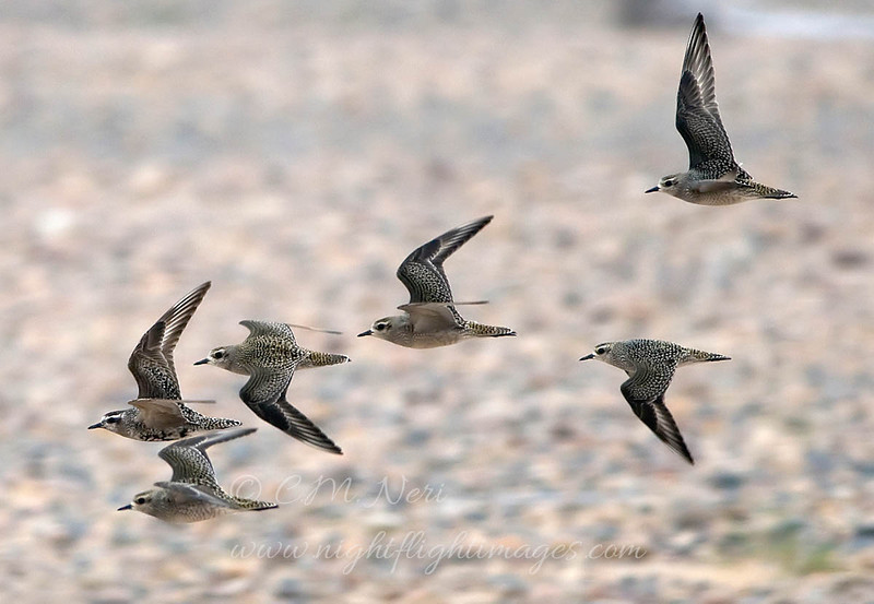 "American Golden-Plover © 2008 C. M. Neri. Whitefish Point, MI AMGOFLT08  <div class=""ss-paypal-button""><div class=""ss-paypal-add-to-cart-section""><div class=""ss-paypal-product-options""><h4>Mat Sizes</h4><ul><li><a href=""https://www.paypal.com/cgi-bin/webscr?cmd=_cart&business=T77V5VKCW4K2U&lc=US&item_name=American%20Golden-Plover%20%C2%A9%202008%20C.%20M.%20Neri.%20Whitefish%20Point%2C%20MI%20AMGOFLT08&item_number=http%3A%2F%2Fwww.nightflightimages.com%2FGalleries-1%2FShore%2Fi-CXMmhph&button_subtype=products&no_note=0&cn=Add%20special%20instructions%20to%20the%20seller%3A&no_shipping=2&currency_code=USD&weight_unit=lbs&add=1&bn=PP-ShopCartBF%3Abtn_cart_SM.gif%3ANonHosted&on0=Mat%20Sizes&option_select0=5%20x%207&option_amount0=10.00&option_select1=8%20x%2010&option_amount1=18.00&option_select2=11%20x%2014&option_amount2=28.00&option_select3=card&option_amount3=4.00&option_index=0&charset=utf-8&submit=&os0=5%20x%207"" target=""paypal""><span>5 x 7 $11.00 USD</span><img src=""https://www.paypalobjects.com/en_US/i/btn/btn_cart_SM.gif""></a></li><li><a href=""https://www.paypal.com/cgi-bin/webscr?cmd=_cart&business=T77V5VKCW4K2U&lc=US&item_name=American%20Golden-Plover%20%C2%A9%202008%20C.%20M.%20Neri.%20Whitefish%20Point%2C%20MI%20AMGOFLT08&item_number=http%3A%2F%2Fwww.nightflightimages.com%2FGalleries-1%2FShore%2Fi-CXMmhph&button_subtype=products&no_note=0&cn=Add%20special%20instructions%20to%20the%20seller%3A&no_shipping=2&currency_code=USD&weight_unit=lbs&add=1&bn=PP-ShopCartBF%3Abtn_cart_SM.gif%3ANonHosted&on0=Mat%20Sizes&option_select0=5%20x%207&option_amount0=10.00&option_select1=8%20x%2010&option_amount1=18.00&option_select2=11%20x%2014&option_amount2=28.00&option_select3=card&option_amount3=4.00&option_index=0&charset=utf-8&submit=&os0=8%20x%2010"" target=""paypal""><span>8 x 10 $19.00 USD</span><img src=""https://www.paypalobjects.com/en_US/i/btn/btn_cart_SM.gif""></a></li><li><a href=""https://www.paypal.com/cgi-bin/webscr?cmd=_cart&business=T77V5VKCW4K2U&lc=US&item_name=American%20Golden-Plover%20%C2%A9%202008%20C.%20M.%20Neri.%20Whitefish%20Point%2C%20MI%20AMGOFLT08&item_number=http%3A%2F%2Fwww.nightflightimages.com%2FGalleries-1%2FShore%2Fi-CXMmhph&button_subtype=products&no_note=0&cn=Add%20special%20instructions%20to%20the%20seller%3A&no_shipping=2&currency_code=USD&weight_unit=lbs&add=1&bn=PP-ShopCartBF%3Abtn_cart_SM.gif%3ANonHosted&on0=Mat%20Sizes&option_select0=5%20x%207&option_amount0=10.00&option_select1=8%20x%2010&option_amount1=18.00&option_select2=11%20x%2014&option_amount2=28.00&option_select3=card&option_amount3=4.00&option_index=0&charset=utf-8&submit=&os0=11%20x%2014"" target=""paypal""><span>11 x 14 $29.00 USD</span><img src=""https://www.paypalobjects.com/en_US/i/btn/btn_cart_SM.gif""></a></li><li><a href=""https://www.paypal.com/cgi-bin/webscr?cmd=_cart&business=T77V5VKCW4K2U&lc=US&item_name=American%20Golden-Plover%20%C2%A9%202008%20C.%20M.%20Neri.%20Whitefish%20Point%2C%20MI%20AMGOFLT08&item_number=http%3A%2F%2Fwww.nightflightimages.com%2FGalleries-1%2FShore%2Fi-CXMmhph&button_subtype=products&no_note=0&cn=Add%20special%20instructions%20to%20the%20seller%3A&no_shipping=2&currency_code=USD&weight_unit=lbs&add=1&bn=PP-ShopCartBF%3Abtn_cart_SM.gif%3ANonHosted&on0=Mat%20Sizes&option_select0=5%20x%207&option_amount0=10.00&option_select1=8%20x%2010&option_amount1=18.00&option_select2=11%20x%2014&option_amount2=28.00&option_select3=card&option_amount3=4.00&option_index=0&charset=utf-8&submit=&os0=card"" target=""paypal""><span>card $5.00 USD</span><img src=""https://www.paypalobjects.com/en_US/i/btn/btn_cart_SM.gif""></a></li></ul></div></div> <div class=""ss-paypal-view-cart-section""><a href=""https://www.paypal.com/cgi-bin/webscr?cmd=_cart&business=T77V5VKCW4K2U&display=1&item_name=American%20Golden-Plover%20%C2%A9%202008%20C.%20M.%20Neri.%20Whitefish%20Point%2C%20MI%20AMGOFLT08&item_number=http%3A%2F%2Fwww.nightflightimages.com%2FGalleries-1%2FShore%2Fi-CXMmhph&charset=utf-8&submit="" target=""paypal"" class=""ss-paypal-submit-button""><img src=""https://www.paypalobjects.com/en_US/i/btn/btn_viewcart_LG.gif""></a></div></div><div class=""ss-paypal-button-end""></div>"