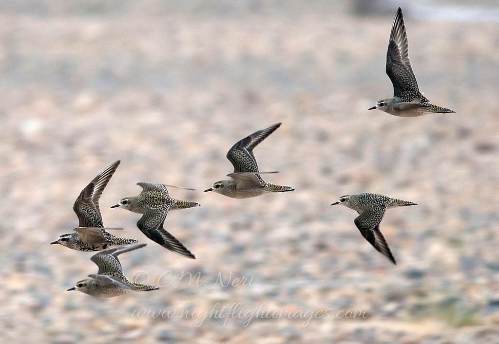 """American Golden-Plover © 2008 C. M. Neri. Whitefish Point, MI AMGOFLT08  <div class=""""ss-paypal-button""""><div class=""""ss-paypal-add-to-cart-section""""><div class=""""ss-paypal-product-options""""><h4>Mat Sizes</h4><ul><li><a href=""""https://www.paypal.com/cgi-bin/webscr?cmd=_cart&business=T77V5VKCW4K2U&lc=US&item_name=American%20Golden-Plover%20%C2%A9%202008%20C.%20M.%20Neri.%20Whitefish%20Point%2C%20MI%20AMGOFLT08&item_number=http%3A%2F%2Fwww.nightflightimages.com%2FGalleries-1%2FShore%2Fi-CXMmhph&button_subtype=products&no_note=0&cn=Add%20special%20instructions%20to%20the%20seller%3A&no_shipping=2&currency_code=USD&weight_unit=lbs&add=1&bn=PP-ShopCartBF%3Abtn_cart_SM.gif%3ANonHosted&on0=Mat%20Sizes&option_select0=5%20x%207&option_amount0=10.00&option_select1=8%20x%2010&option_amount1=18.00&option_select2=11%20x%2014&option_amount2=28.00&option_select3=card&option_amount3=4.00&option_index=0&charset=utf-8&submit=&os0=5%20x%207"""" target=""""paypal""""><span>5 x 7 $11.00 USD</span><img src=""""https://www.paypalobjects.com/en_US/i/btn/btn_cart_SM.gif""""></a></li><li><a href=""""https://www.paypal.com/cgi-bin/webscr?cmd=_cart&business=T77V5VKCW4K2U&lc=US&item_name=American%20Golden-Plover%20%C2%A9%202008%20C.%20M.%20Neri.%20Whitefish%20Point%2C%20MI%20AMGOFLT08&item_number=http%3A%2F%2Fwww.nightflightimages.com%2FGalleries-1%2FShore%2Fi-CXMmhph&button_subtype=products&no_note=0&cn=Add%20special%20instructions%20to%20the%20seller%3A&no_shipping=2&currency_code=USD&weight_unit=lbs&add=1&bn=PP-ShopCartBF%3Abtn_cart_SM.gif%3ANonHosted&on0=Mat%20Sizes&option_select0=5%20x%207&option_amount0=10.00&option_select1=8%20x%2010&option_amount1=18.00&option_select2=11%20x%2014&option_amount2=28.00&option_select3=card&option_amount3=4.00&option_index=0&charset=utf-8&submit=&os0=8%20x%2010"""" target=""""paypal""""><span>8 x 10 $19.00 USD</span><img src=""""https://www.paypalobjects.com/en_US/i/btn/btn_cart_SM.gif""""></a></li><li><a href=""""https://www.paypal.com/cgi-bin/webscr?cmd=_cart&business=T77V5VKCW4K2U&lc=US&item_name"""
