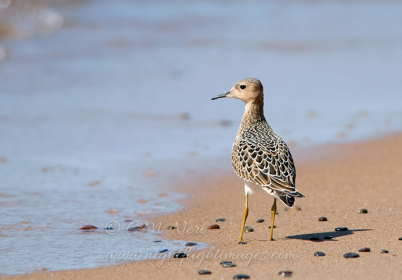 "Buff-breasted Sandpiper © 2008 C. M. Neri Whitefish Point, MI BBSA082  <div class=""ss-paypal-button""><div class=""ss-paypal-add-to-cart-section""><div class=""ss-paypal-product-options""><h4>Mat Sizes</h4><ul><li><a href=""https://www.paypal.com/cgi-bin/webscr?cmd=_cart&amp;business=T77V5VKCW4K2U&amp;lc=US&amp;item_name=Buff-breasted%20Sandpiper%20%C2%A9%202008%20C.%20M.%20Neri%20Whitefish%20Point%2C%20MI%20BBSA082&amp;item_number=http%3A%2F%2Fwww.nightflightimages.com%2FGalleries-1%2FShore%2Fi-JLPGXZ9&amp;button_subtype=products&amp;no_note=0&amp;cn=Add%20special%20instructions%20to%20the%20seller%3A&amp;no_shipping=2&amp;currency_code=USD&amp;weight_unit=lbs&amp;add=1&amp;bn=PP-ShopCartBF%3Abtn_cart_SM.gif%3ANonHosted&amp;on0=Mat%20Sizes&amp;option_select0=5%20x%207&amp;option_amount0=10.00&amp;option_select1=8%20x%2010&amp;option_amount1=18.00&amp;option_select2=11%20x%2014&amp;option_amount2=28.00&amp;option_select3=card&amp;option_amount3=4.00&amp;option_index=0&amp;charset=utf-8&amp;submit=&amp;os0=5%20x%207"" target=""paypal""><span>5 x 7 $11.00 USD</span><img src=""https://www.paypalobjects.com/en_US/i/btn/btn_cart_SM.gif""></a></li><li><a href=""https://www.paypal.com/cgi-bin/webscr?cmd=_cart&amp;business=T77V5VKCW4K2U&amp;lc=US&amp;item_name=Buff-breasted%20Sandpiper%20%C2%A9%202008%20C.%20M.%20Neri%20Whitefish%20Point%2C%20MI%20BBSA082&amp;item_number=http%3A%2F%2Fwww.nightflightimages.com%2FGalleries-1%2FShore%2Fi-JLPGXZ9&amp;button_subtype=products&amp;no_note=0&amp;cn=Add%20special%20instructions%20to%20the%20seller%3A&amp;no_shipping=2&amp;currency_code=USD&amp;weight_unit=lbs&amp;add=1&amp;bn=PP-ShopCartBF%3Abtn_cart_SM.gif%3ANonHosted&amp;on0=Mat%20Sizes&amp;option_select0=5%20x%207&amp;option_amount0=10.00&amp;option_select1=8%20x%2010&amp;option_amount1=18.00&amp;option_select2=11%20x%2014&amp;option_amount2=28.00&amp;option_select3=card&amp;option_amount3=4.00&amp;option_index=0&amp;charset=utf-8&amp;submit=&amp;os0=8%20x%2010"" target=""paypal""><span>8 x 10 $19.00 USD</span><img src=""https://www.paypalobjects.com/en_US/i/btn/btn_cart_SM.gif""></a></li><li><a href=""https://www.paypal.com/cgi-bin/webscr?cmd=_cart&amp;business=T77V5VKCW4K2U&amp;lc=US&amp;item_name=Buff-breasted%20Sandpiper%20%C2%A9%202008%20C.%20M.%20Neri%20Whitefish%20Point%2C%20MI%20BBSA082&amp;item_number=http%3A%2F%2Fwww.nightflightimages.com%2FGalleries-1%2FShore%2Fi-JLPGXZ9&amp;button_subtype=products&amp;no_note=0&amp;cn=Add%20special%20instructions%20to%20the%20seller%3A&amp;no_shipping=2&amp;currency_code=USD&amp;weight_unit=lbs&amp;add=1&amp;bn=PP-ShopCartBF%3Abtn_cart_SM.gif%3ANonHosted&amp;on0=Mat%20Sizes&amp;option_select0=5%20x%207&amp;option_amount0=10.00&amp;option_select1=8%20x%2010&amp;option_amount1=18.00&amp;option_select2=11%20x%2014&amp;option_amount2=28.00&amp;option_select3=card&amp;option_amount3=4.00&amp;option_index=0&amp;charset=utf-8&amp;submit=&amp;os0=11%20x%2014"" target=""paypal""><span>11 x 14 $29.00 USD</span><img src=""https://www.paypalobjects.com/en_US/i/btn/btn_cart_SM.gif""></a></li><li><a href=""https://www.paypal.com/cgi-bin/webscr?cmd=_cart&amp;business=T77V5VKCW4K2U&amp;lc=US&amp;item_name=Buff-breasted%20Sandpiper%20%C2%A9%202008%20C.%20M.%20Neri%20Whitefish%20Point%2C%20MI%20BBSA082&amp;item_number=http%3A%2F%2Fwww.nightflightimages.com%2FGalleries-1%2FShore%2Fi-JLPGXZ9&amp;button_subtype=products&amp;no_note=0&amp;cn=Add%20special%20instructions%20to%20the%20seller%3A&amp;no_shipping=2&amp;currency_code=USD&amp;weight_unit=lbs&amp;add=1&amp;bn=PP-ShopCartBF%3Abtn_cart_SM.gif%3ANonHosted&amp;on0=Mat%20Sizes&amp;option_select0=5%20x%207&amp;option_amount0=10.00&amp;option_select1=8%20x%2010&amp;option_amount1=18.00&amp;option_select2=11%20x%2014&amp;option_amount2=28.00&amp;option_select3=card&amp;option_amount3=4.00&amp;option_index=0&amp;charset=utf-8&amp;submit=&amp;os0=card"" target=""paypal""><span>card $5.00 USD</span><img src=""https://www.paypalobjects.com/en_US/i/btn/btn_cart_SM.gif""></a></li></ul></div></div> <div class=""ss-paypal-view-cart-section""><a href=""https://www.paypal.com/cgi-bin/webscr?cmd=_cart&amp;business=T77V5VKCW4K2U&amp;display=1&amp;item_name=Buff-breasted%20Sandpiper%20%C2%A9%202008%20C.%20M.%20Neri%20Whitefish%20Point%2C%20MI%20BBSA082&amp;item_number=http%3A%2F%2Fwww.nightflightimages.com%2FGalleries-1%2FShore%2Fi-JLPGXZ9&amp;charset=utf-8&amp;submit="" target=""paypal"" class=""ss-paypal-submit-button""><img src=""https://www.paypalobjects.com/en_US/i/btn/btn_viewcart_LG.gif""></a></div></div><div class=""ss-paypal-button-end""></div>"