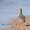 """Buff-breasted Sandpiper © 2008 C. M. Neri Whitefish Point, MI BBSA082  <div class=""""ss-paypal-button""""><div class=""""ss-paypal-add-to-cart-section""""><div class=""""ss-paypal-product-options""""><h4>Mat Sizes</h4><ul><li><a href=""""https://www.paypal.com/cgi-bin/webscr?cmd=_cart&business=T77V5VKCW4K2U&lc=US&item_name=Buff-breasted%20Sandpiper%20%C2%A9%202008%20C.%20M.%20Neri%20Whitefish%20Point%2C%20MI%20BBSA082&item_number=http%3A%2F%2Fwww.nightflightimages.com%2FGalleries-1%2FShore%2Fi-JLPGXZ9&button_subtype=products&no_note=0&cn=Add%20special%20instructions%20to%20the%20seller%3A&no_shipping=2&currency_code=USD&weight_unit=lbs&add=1&bn=PP-ShopCartBF%3Abtn_cart_SM.gif%3ANonHosted&on0=Mat%20Sizes&option_select0=5%20x%207&option_amount0=10.00&option_select1=8%20x%2010&option_amount1=18.00&option_select2=11%20x%2014&option_amount2=28.00&option_select3=card&option_amount3=4.00&option_index=0&charset=utf-8&submit=&os0=5%20x%207"""" target=""""paypal""""><span>5 x 7 $11.00 USD</span><img src=""""https://www.paypalobjects.com/en_US/i/btn/btn_cart_SM.gif""""></a></li><li><a href=""""https://www.paypal.com/cgi-bin/webscr?cmd=_cart&business=T77V5VKCW4K2U&lc=US&item_name=Buff-breasted%20Sandpiper%20%C2%A9%202008%20C.%20M.%20Neri%20Whitefish%20Point%2C%20MI%20BBSA082&item_number=http%3A%2F%2Fwww.nightflightimages.com%2FGalleries-1%2FShore%2Fi-JLPGXZ9&button_subtype=products&no_note=0&cn=Add%20special%20instructions%20to%20the%20seller%3A&no_shipping=2&currency_code=USD&weight_unit=lbs&add=1&bn=PP-ShopCartBF%3Abtn_cart_SM.gif%3ANonHosted&on0=Mat%20Sizes&option_select0=5%20x%207&option_amount0=10.00&option_select1=8%20x%2010&option_amount1=18.00&option_select2=11%20x%2014&option_amount2=28.00&option_select3=card&option_amount3=4.00&option_index=0&charset=utf-8&submit=&os0=8%20x%2010"""" target=""""paypal""""><span>8 x 10 $19.00 USD</span><img src=""""https://www.paypalobjects.com/en_US/i/btn/btn_cart_SM.gif""""></a></li><li><a href=""""https://www.paypal.com/cgi-bin/webscr?cmd=_cart&business=T77V5VKCW4K2U&lc=US&item_name=Buff-"""
