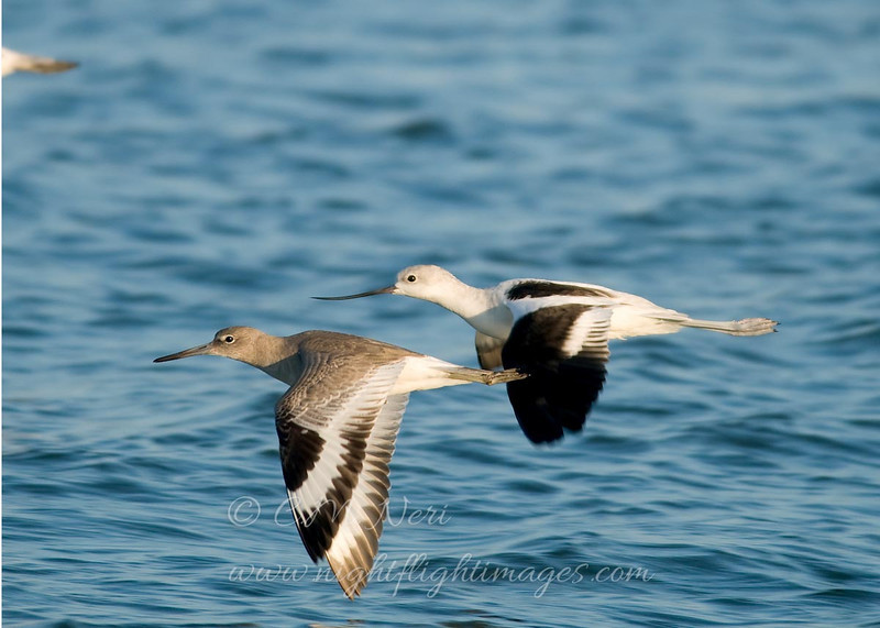 "American Avocet &amp; Willet © 2009 C. M. Neri.  Boca Chica, TX AMAVWILL  <div class=""ss-paypal-button""><div class=""ss-paypal-add-to-cart-section""><div class=""ss-paypal-product-options""><h4>Mat Sizes</h4><ul><li><a href=""https://www.paypal.com/cgi-bin/webscr?cmd=_cart&amp;business=T77V5VKCW4K2U&amp;lc=US&amp;item_name=American%20Avocet%20%26amp%3B%20Willet%20%C2%A9%202009%20C.%20M.%20Neri.%20%20Boca%20Chica%2C%20TX%20AMAVWILL&amp;item_number=http%3A%2F%2Fwww.nightflightimages.com%2FGalleries-1%2FShore%2Fi-JwFqTpD&amp;button_subtype=products&amp;no_note=0&amp;cn=Add%20special%20instructions%20to%20the%20seller%3A&amp;no_shipping=2&amp;currency_code=USD&amp;weight_unit=lbs&amp;add=1&amp;bn=PP-ShopCartBF%3Abtn_cart_SM.gif%3ANonHosted&amp;on0=Mat%20Sizes&amp;option_select0=5%20x%207&amp;option_amount0=10.00&amp;option_select1=8%20x%2010&amp;option_amount1=18.00&amp;option_select2=11%20x%2014&amp;option_amount2=28.00&amp;option_select3=card&amp;option_amount3=4.00&amp;option_index=0&amp;charset=utf-8&amp;submit=&amp;os0=5%20x%207"" target=""paypal""><span>5 x 7 $11.00 USD</span><img src=""https://www.paypalobjects.com/en_US/i/btn/btn_cart_SM.gif""></a></li><li><a href=""https://www.paypal.com/cgi-bin/webscr?cmd=_cart&amp;business=T77V5VKCW4K2U&amp;lc=US&amp;item_name=American%20Avocet%20%26amp%3B%20Willet%20%C2%A9%202009%20C.%20M.%20Neri.%20%20Boca%20Chica%2C%20TX%20AMAVWILL&amp;item_number=http%3A%2F%2Fwww.nightflightimages.com%2FGalleries-1%2FShore%2Fi-JwFqTpD&amp;button_subtype=products&amp;no_note=0&amp;cn=Add%20special%20instructions%20to%20the%20seller%3A&amp;no_shipping=2&amp;currency_code=USD&amp;weight_unit=lbs&amp;add=1&amp;bn=PP-ShopCartBF%3Abtn_cart_SM.gif%3ANonHosted&amp;on0=Mat%20Sizes&amp;option_select0=5%20x%207&amp;option_amount0=10.00&amp;option_select1=8%20x%2010&amp;option_amount1=18.00&amp;option_select2=11%20x%2014&amp;option_amount2=28.00&amp;option_select3=card&amp;option_amount3=4.00&amp;option_index=0&amp;charset=utf-8&amp;submit=&amp;os0=8%20x%2010"" target=""paypal""><span>8 x 10 $19.00 USD</span><img src=""https://www.paypalobjects.com/en_US/i/btn/btn_cart_SM.gif""></a></li><li><a href=""https://www.paypal.com/cgi-bin/webscr?cmd=_cart&amp;business=T77V5VKCW4K2U&amp;lc=US&amp;item_name=American%20Avocet%20%26amp%3B%20Willet%20%C2%A9%202009%20C.%20M.%20Neri.%20%20Boca%20Chica%2C%20TX%20AMAVWILL&amp;item_number=http%3A%2F%2Fwww.nightflightimages.com%2FGalleries-1%2FShore%2Fi-JwFqTpD&amp;button_subtype=products&amp;no_note=0&amp;cn=Add%20special%20instructions%20to%20the%20seller%3A&amp;no_shipping=2&amp;currency_code=USD&amp;weight_unit=lbs&amp;add=1&amp;bn=PP-ShopCartBF%3Abtn_cart_SM.gif%3ANonHosted&amp;on0=Mat%20Sizes&amp;option_select0=5%20x%207&amp;option_amount0=10.00&amp;option_select1=8%20x%2010&amp;option_amount1=18.00&amp;option_select2=11%20x%2014&amp;option_amount2=28.00&amp;option_select3=card&amp;option_amount3=4.00&amp;option_index=0&amp;charset=utf-8&amp;submit=&amp;os0=11%20x%2014"" target=""paypal""><span>11 x 14 $29.00 USD</span><img src=""https://www.paypalobjects.com/en_US/i/btn/btn_cart_SM.gif""></a></li><li><a href=""https://www.paypal.com/cgi-bin/webscr?cmd=_cart&amp;business=T77V5VKCW4K2U&amp;lc=US&amp;item_name=American%20Avocet%20%26amp%3B%20Willet%20%C2%A9%202009%20C.%20M.%20Neri.%20%20Boca%20Chica%2C%20TX%20AMAVWILL&amp;item_number=http%3A%2F%2Fwww.nightflightimages.com%2FGalleries-1%2FShore%2Fi-JwFqTpD&amp;button_subtype=products&amp;no_note=0&amp;cn=Add%20special%20instructions%20to%20the%20seller%3A&amp;no_shipping=2&amp;currency_code=USD&amp;weight_unit=lbs&amp;add=1&amp;bn=PP-ShopCartBF%3Abtn_cart_SM.gif%3ANonHosted&amp;on0=Mat%20Sizes&amp;option_select0=5%20x%207&amp;option_amount0=10.00&amp;option_select1=8%20x%2010&amp;option_amount1=18.00&amp;option_select2=11%20x%2014&amp;option_amount2=28.00&amp;option_select3=card&amp;option_amount3=4.00&amp;option_index=0&amp;charset=utf-8&amp;submit=&amp;os0=card"" target=""paypal""><span>card $5.00 USD</span><img src=""https://www.paypalobjects.com/en_US/i/btn/btn_cart_SM.gif""></a></li></ul></div></div> <div class=""ss-paypal-view-cart-section""><a href=""https://www.paypal.com/cgi-bin/webscr?cmd=_cart&amp;business=T77V5VKCW4K2U&amp;display=1&amp;item_name=American%20Avocet%20%26amp%3B%20Willet%20%C2%A9%202009%20C.%20M.%20Neri.%20%20Boca%20Chica%2C%20TX%20AMAVWILL&amp;item_number=http%3A%2F%2Fwww.nightflightimages.com%2FGalleries-1%2FShore%2Fi-JwFqTpD&amp;charset=utf-8&amp;submit="" target=""paypal"" class=""ss-paypal-submit-button""><img src=""https://www.paypalobjects.com/en_US/i/btn/btn_viewcart_LG.gif""></a></div></div><div class=""ss-paypal-button-end""></div>"