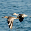 "American Avocet & Willet © 2009 C. M. Neri.  Boca Chica, TX AMAVWILL  <div class=""ss-paypal-button""><div class=""ss-paypal-add-to-cart-section""><div class=""ss-paypal-product-options""><h4>Mat Sizes</h4><ul><li><a href=""https://www.paypal.com/cgi-bin/webscr?cmd=_cart&business=T77V5VKCW4K2U&lc=US&item_name=American%20Avocet%20%26amp%3B%20Willet%20%C2%A9%202009%20C.%20M.%20Neri.%20%20Boca%20Chica%2C%20TX%20AMAVWILL&item_number=http%3A%2F%2Fwww.nightflightimages.com%2FGalleries-1%2FShore%2Fi-JwFqTpD&button_subtype=products&no_note=0&cn=Add%20special%20instructions%20to%20the%20seller%3A&no_shipping=2&currency_code=USD&weight_unit=lbs&add=1&bn=PP-ShopCartBF%3Abtn_cart_SM.gif%3ANonHosted&on0=Mat%20Sizes&option_select0=5%20x%207&option_amount0=10.00&option_select1=8%20x%2010&option_amount1=18.00&option_select2=11%20x%2014&option_amount2=28.00&option_select3=card&option_amount3=4.00&option_index=0&charset=utf-8&submit=&os0=5%20x%207"" target=""paypal""><span>5 x 7 $11.00 USD</span><img src=""https://www.paypalobjects.com/en_US/i/btn/btn_cart_SM.gif""></a></li><li><a href=""https://www.paypal.com/cgi-bin/webscr?cmd=_cart&business=T77V5VKCW4K2U&lc=US&item_name=American%20Avocet%20%26amp%3B%20Willet%20%C2%A9%202009%20C.%20M.%20Neri.%20%20Boca%20Chica%2C%20TX%20AMAVWILL&item_number=http%3A%2F%2Fwww.nightflightimages.com%2FGalleries-1%2FShore%2Fi-JwFqTpD&button_subtype=products&no_note=0&cn=Add%20special%20instructions%20to%20the%20seller%3A&no_shipping=2&currency_code=USD&weight_unit=lbs&add=1&bn=PP-ShopCartBF%3Abtn_cart_SM.gif%3ANonHosted&on0=Mat%20Sizes&option_select0=5%20x%207&option_amount0=10.00&option_select1=8%20x%2010&option_amount1=18.00&option_select2=11%20x%2014&option_amount2=28.00&option_select3=card&option_amount3=4.00&option_index=0&charset=utf-8&submit=&os0=8%20x%2010"" target=""paypal""><span>8 x 10 $19.00 USD</span><img src=""https://www.paypalobjects.com/en_US/i/btn/btn_cart_SM.gif""></a></li><li><a href=""https://www.paypal.com/cgi-bin/webscr?cmd=_cart&business=T77V5VKCW4K2U&lc=US&item_name=American%20Avocet%20%26amp%3B%20Willet%20%C2%A9%202009%20C.%20M.%20Neri.%20%20Boca%20Chica%2C%20TX%20AMAVWILL&item_number=http%3A%2F%2Fwww.nightflightimages.com%2FGalleries-1%2FShore%2Fi-JwFqTpD&button_subtype=products&no_note=0&cn=Add%20special%20instructions%20to%20the%20seller%3A&no_shipping=2&currency_code=USD&weight_unit=lbs&add=1&bn=PP-ShopCartBF%3Abtn_cart_SM.gif%3ANonHosted&on0=Mat%20Sizes&option_select0=5%20x%207&option_amount0=10.00&option_select1=8%20x%2010&option_amount1=18.00&option_select2=11%20x%2014&option_amount2=28.00&option_select3=card&option_amount3=4.00&option_index=0&charset=utf-8&submit=&os0=11%20x%2014"" target=""paypal""><span>11 x 14 $29.00 USD</span><img src=""https://www.paypalobjects.com/en_US/i/btn/btn_cart_SM.gif""></a></li><li><a href=""https://www.paypal.com/cgi-bin/webscr?cmd=_cart&business=T77V5VKCW4K2U&lc=US&item_name=American%20Avocet%20%26amp%3B%20Willet%20%C2%A9%202009%20C.%20M.%20Neri.%20%20Boca%20Chica%2C%20TX%20AMAVWILL&item_number=http%3A%2F%2Fwww.nightflightimages.com%2FGalleries-1%2FShore%2Fi-JwFqTpD&button_subtype=products&no_note=0&cn=Add%20special%20instructions%20to%20the%20seller%3A&no_shipping=2&currency_code=USD&weight_unit=lbs&add=1&bn=PP-ShopCartBF%3Abtn_cart_SM.gif%3ANonHosted&on0=Mat%20Sizes&option_select0=5%20x%207&option_amount0=10.00&option_select1=8%20x%2010&option_amount1=18.00&option_select2=11%20x%2014&option_amount2=28.00&option_select3=card&option_amount3=4.00&option_index=0&charset=utf-8&submit=&os0=card"" target=""paypal""><span>card $5.00 USD</span><img src=""https://www.paypalobjects.com/en_US/i/btn/btn_cart_SM.gif""></a></li></ul></div></div> <div class=""ss-paypal-view-cart-section""><a href=""https://www.paypal.com/cgi-bin/webscr?cmd=_cart&business=T77V5VKCW4K2U&display=1&item_name=American%20Avocet%20%26amp%3B%20Willet%20%C2%A9%202009%20C.%20M.%20Neri.%20%20Boca%20Chica%2C%20TX%20AMAVWILL&item_number=http%3A%2F%2Fwww.nightflightimages.com%2FGalleries-1%2FShore%2Fi-JwFqTpD&charset=utf-8&submit="" target=""paypal"" class=""ss-paypal-submit-button""><img src=""https://www.paypalobjects.com/en_US/i/btn/btn_viewcart_LG.gif""></a></div></div><div class=""ss-paypal-button-end""></div>"