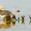 """Buff-breasted Sandpiper © 2009 Nova Mackentley Whitefish Point, MI BBS  <div class=""""ss-paypal-button""""><div class=""""ss-paypal-add-to-cart-section""""><div class=""""ss-paypal-product-options""""><h4>Mat Sizes</h4><ul><li><a href=""""https://www.paypal.com/cgi-bin/webscr?cmd=_cart&amp;business=T77V5VKCW4K2U&amp;lc=US&amp;item_name=Buff-breasted%20Sandpiper%20%C2%A9%202009%20Nova%20Mackentley%20Whitefish%20Point%2C%20MI%20BBS&amp;item_number=http%3A%2F%2Fwww.nightflightimages.com%2FGalleries-1%2FShore%2Fi-Nxjz9Fq&amp;button_subtype=products&amp;no_note=0&amp;cn=Add%20special%20instructions%20to%20the%20seller%3A&amp;no_shipping=2&amp;currency_code=USD&amp;weight_unit=lbs&amp;add=1&amp;bn=PP-ShopCartBF%3Abtn_cart_SM.gif%3ANonHosted&amp;on0=Mat%20Sizes&amp;option_select0=5%20x%207&amp;option_amount0=10.00&amp;option_select1=8%20x%2010&amp;option_amount1=18.00&amp;option_select2=11%20x%2014&amp;option_amount2=28.00&amp;option_select3=card&amp;option_amount3=4.00&amp;option_index=0&amp;charset=utf-8&amp;submit=&amp;os0=5%20x%207"""" target=""""paypal""""><span>5 x 7 $11.00 USD</span><img src=""""https://www.paypalobjects.com/en_US/i/btn/btn_cart_SM.gif""""></a></li><li><a href=""""https://www.paypal.com/cgi-bin/webscr?cmd=_cart&amp;business=T77V5VKCW4K2U&amp;lc=US&amp;item_name=Buff-breasted%20Sandpiper%20%C2%A9%202009%20Nova%20Mackentley%20Whitefish%20Point%2C%20MI%20BBS&amp;item_number=http%3A%2F%2Fwww.nightflightimages.com%2FGalleries-1%2FShore%2Fi-Nxjz9Fq&amp;button_subtype=products&amp;no_note=0&amp;cn=Add%20special%20instructions%20to%20the%20seller%3A&amp;no_shipping=2&amp;currency_code=USD&amp;weight_unit=lbs&amp;add=1&amp;bn=PP-ShopCartBF%3Abtn_cart_SM.gif%3ANonHosted&amp;on0=Mat%20Sizes&amp;option_select0=5%20x%207&amp;option_amount0=10.00&amp;option_select1=8%20x%2010&amp;option_amount1=18.00&amp;option_select2=11%20x%2014&amp;option_amount2=28.00&amp;option_select3=card&amp;option_amount3=4.00&amp;option_index=0&amp;charset=utf-8&amp;submit=&amp;os0=8%20x%2010"""" target=""""paypal""""><span>8 x 10 $"""