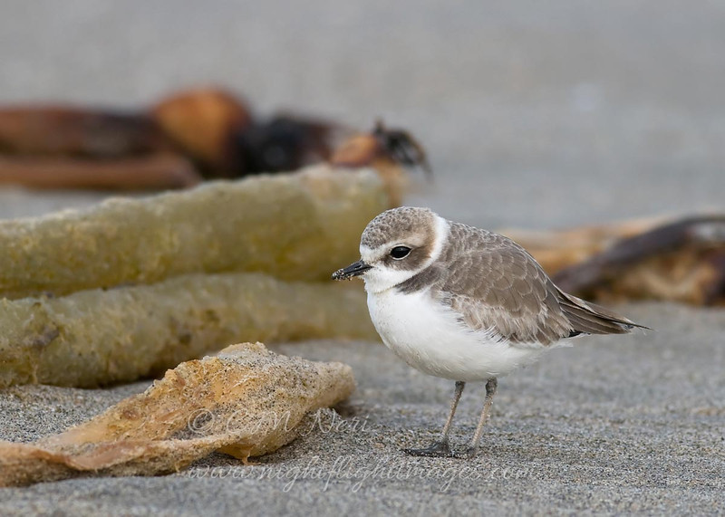 """Snowy Plover © 2010 C. M. Neri.  Moss Landing, CA SNPL  <div class=""""ss-paypal-button""""><div class=""""ss-paypal-add-to-cart-section""""><div class=""""ss-paypal-product-options""""><h4>Mat Sizes</h4><ul><li><a href=""""https://www.paypal.com/cgi-bin/webscr?cmd=_cart&business=T77V5VKCW4K2U&lc=US&item_name=Snowy%20Plover%20%C2%A9%202010%20C.%20M.%20Neri.%20%20Moss%20Landing%2C%20CA%20SNPL&item_number=http%3A%2F%2Fwww.nightflightimages.com%2FGalleries-1%2FTravels%2Fi-PDf8M5L&button_subtype=products&no_note=0&cn=Add%20special%20instructions%20to%20the%20seller%3A&no_shipping=2&currency_code=USD&weight_unit=lbs&add=1&bn=PP-ShopCartBF%3Abtn_cart_SM.gif%3ANonHosted&on0=Mat%20Sizes&option_select0=5%20x%207&option_amount0=10.00&option_select1=8%20x%2010&option_amount1=18.00&option_select2=11%20x%2014&option_amount2=28.00&option_select3=card&option_amount3=4.00&option_index=0&charset=utf-8&submit=&os0=5%20x%207"""" target=""""paypal""""><span>5 x 7 $11.00 USD</span><img src=""""https://www.paypalobjects.com/en_US/i/btn/btn_cart_SM.gif""""></a></li><li><a href=""""https://www.paypal.com/cgi-bin/webscr?cmd=_cart&business=T77V5VKCW4K2U&lc=US&item_name=Snowy%20Plover%20%C2%A9%202010%20C.%20M.%20Neri.%20%20Moss%20Landing%2C%20CA%20SNPL&item_number=http%3A%2F%2Fwww.nightflightimages.com%2FGalleries-1%2FTravels%2Fi-PDf8M5L&button_subtype=products&no_note=0&cn=Add%20special%20instructions%20to%20the%20seller%3A&no_shipping=2&currency_code=USD&weight_unit=lbs&add=1&bn=PP-ShopCartBF%3Abtn_cart_SM.gif%3ANonHosted&on0=Mat%20Sizes&option_select0=5%20x%207&option_amount0=10.00&option_select1=8%20x%2010&option_amount1=18.00&option_select2=11%20x%2014&option_amount2=28.00&option_select3=card&option_amount3=4.00&option_index=0&charset=utf-8&submit=&os0=8%20x%2010"""" target=""""paypal""""><span>8 x 10 $19.00 USD</span><img src=""""https://www.paypalobjects.com/en_US/i/btn/btn_cart_SM.gif""""></a></li><li><a href=""""https://www.paypal.com/cgi-bin/webscr?cmd=_cart&business=T77V5VKCW4K2U&lc=US&item_name=Snowy%20Plover%20%C2%A9%202010%20C.%20M.%2"""