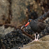 "Black Oystercatcher © 2010 C. M. Neri. Monterey, CA BLOY  <div class=""ss-paypal-button""><div class=""ss-paypal-add-to-cart-section""><div class=""ss-paypal-product-options""><h4>Mat Sizes</h4><ul><li><a href=""https://www.paypal.com/cgi-bin/webscr?cmd=_cart&amp;business=T77V5VKCW4K2U&amp;lc=US&amp;item_name=Black%20Oystercatcher%20%C2%A9%202010%20C.%20M.%20Neri.%20Monterey%2C%20CA%20BLOY&amp;item_number=http%3A%2F%2Fwww.nightflightimages.com%2FGalleries-1%2FTravels%2Fi-QPVZCK8&amp;button_subtype=products&amp;no_note=0&amp;cn=Add%20special%20instructions%20to%20the%20seller%3A&amp;no_shipping=2&amp;currency_code=USD&amp;weight_unit=lbs&amp;add=1&amp;bn=PP-ShopCartBF%3Abtn_cart_SM.gif%3ANonHosted&amp;on0=Mat%20Sizes&amp;option_select0=5%20x%207&amp;option_amount0=10.00&amp;option_select1=8%20x%2010&amp;option_amount1=18.00&amp;option_select2=11%20x%2014&amp;option_amount2=28.00&amp;option_select3=card&amp;option_amount3=4.00&amp;option_index=0&amp;charset=utf-8&amp;submit=&amp;os0=5%20x%207"" target=""paypal""><span>5 x 7 $11.00 USD</span><img src=""https://www.paypalobjects.com/en_US/i/btn/btn_cart_SM.gif""></a></li><li><a href=""https://www.paypal.com/cgi-bin/webscr?cmd=_cart&amp;business=T77V5VKCW4K2U&amp;lc=US&amp;item_name=Black%20Oystercatcher%20%C2%A9%202010%20C.%20M.%20Neri.%20Monterey%2C%20CA%20BLOY&amp;item_number=http%3A%2F%2Fwww.nightflightimages.com%2FGalleries-1%2FTravels%2Fi-QPVZCK8&amp;button_subtype=products&amp;no_note=0&amp;cn=Add%20special%20instructions%20to%20the%20seller%3A&amp;no_shipping=2&amp;currency_code=USD&amp;weight_unit=lbs&amp;add=1&amp;bn=PP-ShopCartBF%3Abtn_cart_SM.gif%3ANonHosted&amp;on0=Mat%20Sizes&amp;option_select0=5%20x%207&amp;option_amount0=10.00&amp;option_select1=8%20x%2010&amp;option_amount1=18.00&amp;option_select2=11%20x%2014&amp;option_amount2=28.00&amp;option_select3=card&amp;option_amount3=4.00&amp;option_index=0&amp;charset=utf-8&amp;submit=&amp;os0=8%20x%2010"" target=""paypal""><span>8 x 10 $19.00 USD</span><img src=""https://www.paypalobjects.com/en_US/i/btn/btn_cart_SM.gif""></a></li><li><a href=""https://www.paypal.com/cgi-bin/webscr?cmd=_cart&amp;business=T77V5VKCW4K2U&amp;lc=US&amp;item_name=Black%20Oystercatcher%20%C2%A9%202010%20C.%20M.%20Neri.%20Monterey%2C%20CA%20BLOY&amp;item_number=http%3A%2F%2Fwww.nightflightimages.com%2FGalleries-1%2FTravels%2Fi-QPVZCK8&amp;button_subtype=products&amp;no_note=0&amp;cn=Add%20special%20instructions%20to%20the%20seller%3A&amp;no_shipping=2&amp;currency_code=USD&amp;weight_unit=lbs&amp;add=1&amp;bn=PP-ShopCartBF%3Abtn_cart_SM.gif%3ANonHosted&amp;on0=Mat%20Sizes&amp;option_select0=5%20x%207&amp;option_amount0=10.00&amp;option_select1=8%20x%2010&amp;option_amount1=18.00&amp;option_select2=11%20x%2014&amp;option_amount2=28.00&amp;option_select3=card&amp;option_amount3=4.00&amp;option_index=0&amp;charset=utf-8&amp;submit=&amp;os0=11%20x%2014"" target=""paypal""><span>11 x 14 $29.00 USD</span><img src=""https://www.paypalobjects.com/en_US/i/btn/btn_cart_SM.gif""></a></li><li><a href=""https://www.paypal.com/cgi-bin/webscr?cmd=_cart&amp;business=T77V5VKCW4K2U&amp;lc=US&amp;item_name=Black%20Oystercatcher%20%C2%A9%202010%20C.%20M.%20Neri.%20Monterey%2C%20CA%20BLOY&amp;item_number=http%3A%2F%2Fwww.nightflightimages.com%2FGalleries-1%2FTravels%2Fi-QPVZCK8&amp;button_subtype=products&amp;no_note=0&amp;cn=Add%20special%20instructions%20to%20the%20seller%3A&amp;no_shipping=2&amp;currency_code=USD&amp;weight_unit=lbs&amp;add=1&amp;bn=PP-ShopCartBF%3Abtn_cart_SM.gif%3ANonHosted&amp;on0=Mat%20Sizes&amp;option_select0=5%20x%207&amp;option_amount0=10.00&amp;option_select1=8%20x%2010&amp;option_amount1=18.00&amp;option_select2=11%20x%2014&amp;option_amount2=28.00&amp;option_select3=card&amp;option_amount3=4.00&amp;option_index=0&amp;charset=utf-8&amp;submit=&amp;os0=card"" target=""paypal""><span>card $5.00 USD</span><img src=""https://www.paypalobjects.com/en_US/i/btn/btn_cart_SM.gif""></a></li></ul></div></div> <div class=""ss-paypal-view-cart-section""><a href=""https://www.paypal.com/cgi-bin/webscr?cmd=_cart&amp;business=T77V5VKCW4K2U&amp;display=1&amp;item_name=Black%20Oystercatcher%20%C2%A9%202010%20C.%20M.%20Neri.%20Monterey%2C%20CA%20BLOY&amp;item_number=http%3A%2F%2Fwww.nightflightimages.com%2FGalleries-1%2FTravels%2Fi-QPVZCK8&amp;charset=utf-8&amp;submit="" target=""paypal"" class=""ss-paypal-submit-button""><img src=""https://www.paypalobjects.com/en_US/i/btn/btn_viewcart_LG.gif""></a></div></div><div class=""ss-paypal-button-end""></div>"