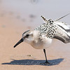 """Sanderling © 2008 C. M. Neri Whitefish Point, MI SNADWS  <div class=""""ss-paypal-button""""><div class=""""ss-paypal-add-to-cart-section""""><div class=""""ss-paypal-product-options""""><h4>Mat Sizes</h4><ul><li><a href=""""https://www.paypal.com/cgi-bin/webscr?cmd=_cart&amp;business=T77V5VKCW4K2U&amp;lc=US&amp;item_name=Sanderling%20%C2%A9%202008%20C.%20M.%20Neri%20Whitefish%20Point%2C%20MI%20SNADWS&amp;item_number=http%3A%2F%2Fwww.nightflightimages.com%2FGalleries-1%2FShore%2Fi-S4mMZ5L&amp;button_subtype=products&amp;no_note=0&amp;cn=Add%20special%20instructions%20to%20the%20seller%3A&amp;no_shipping=2&amp;currency_code=USD&amp;weight_unit=lbs&amp;add=1&amp;bn=PP-ShopCartBF%3Abtn_cart_SM.gif%3ANonHosted&amp;on0=Mat%20Sizes&amp;option_select0=5%20x%207&amp;option_amount0=10.00&amp;option_select1=8%20x%2010&amp;option_amount1=18.00&amp;option_select2=11%20x%2014&amp;option_amount2=28.00&amp;option_select3=card&amp;option_amount3=4.00&amp;option_index=0&amp;charset=utf-8&amp;submit=&amp;os0=5%20x%207"""" target=""""paypal""""><span>5 x 7 $11.00 USD</span><img src=""""https://www.paypalobjects.com/en_US/i/btn/btn_cart_SM.gif""""></a></li><li><a href=""""https://www.paypal.com/cgi-bin/webscr?cmd=_cart&amp;business=T77V5VKCW4K2U&amp;lc=US&amp;item_name=Sanderling%20%C2%A9%202008%20C.%20M.%20Neri%20Whitefish%20Point%2C%20MI%20SNADWS&amp;item_number=http%3A%2F%2Fwww.nightflightimages.com%2FGalleries-1%2FShore%2Fi-S4mMZ5L&amp;button_subtype=products&amp;no_note=0&amp;cn=Add%20special%20instructions%20to%20the%20seller%3A&amp;no_shipping=2&amp;currency_code=USD&amp;weight_unit=lbs&amp;add=1&amp;bn=PP-ShopCartBF%3Abtn_cart_SM.gif%3ANonHosted&amp;on0=Mat%20Sizes&amp;option_select0=5%20x%207&amp;option_amount0=10.00&amp;option_select1=8%20x%2010&amp;option_amount1=18.00&amp;option_select2=11%20x%2014&amp;option_amount2=28.00&amp;option_select3=card&amp;option_amount3=4.00&amp;option_index=0&amp;charset=utf-8&amp;submit=&amp;os0=8%20x%2010"""" target=""""paypal""""><span>8 x 10 $19.00 USD</span><img src=""""https://www.paypalo"""