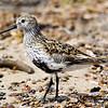 "Dunlin © 2009 C. M. Neri.  Whitefish Point, MI DUNLWP  <div class=""ss-paypal-button""><div class=""ss-paypal-add-to-cart-section""><div class=""ss-paypal-product-options""><h4>Mat Sizes</h4><ul><li><a href=""https://www.paypal.com/cgi-bin/webscr?cmd=_cart&business=T77V5VKCW4K2U&lc=US&item_name=Dunlin%20%C2%A9%202009%20C.%20M.%20Neri.%20%20Whitefish%20Point%2C%20MI%20DUNLWP&item_number=http%3A%2F%2Fwww.nightflightimages.com%2FGalleries-1%2FShore%2Fi-XSPMB8N&button_subtype=products&no_note=0&cn=Add%20special%20instructions%20to%20the%20seller%3A&no_shipping=2&currency_code=USD&weight_unit=lbs&add=1&bn=PP-ShopCartBF%3Abtn_cart_SM.gif%3ANonHosted&on0=Mat%20Sizes&option_select0=5%20x%207&option_amount0=10.00&option_select1=8%20x%2010&option_amount1=18.00&option_select2=11%20x%2014&option_amount2=28.00&option_select3=card&option_amount3=4.00&option_index=0&charset=utf-8&submit=&os0=5%20x%207"" target=""paypal""><span>5 x 7 $11.00 USD</span><img src=""https://www.paypalobjects.com/en_US/i/btn/btn_cart_SM.gif""></a></li><li><a href=""https://www.paypal.com/cgi-bin/webscr?cmd=_cart&business=T77V5VKCW4K2U&lc=US&item_name=Dunlin%20%C2%A9%202009%20C.%20M.%20Neri.%20%20Whitefish%20Point%2C%20MI%20DUNLWP&item_number=http%3A%2F%2Fwww.nightflightimages.com%2FGalleries-1%2FShore%2Fi-XSPMB8N&button_subtype=products&no_note=0&cn=Add%20special%20instructions%20to%20the%20seller%3A&no_shipping=2&currency_code=USD&weight_unit=lbs&add=1&bn=PP-ShopCartBF%3Abtn_cart_SM.gif%3ANonHosted&on0=Mat%20Sizes&option_select0=5%20x%207&option_amount0=10.00&option_select1=8%20x%2010&option_amount1=18.00&option_select2=11%20x%2014&option_amount2=28.00&option_select3=card&option_amount3=4.00&option_index=0&charset=utf-8&submit=&os0=8%20x%2010"" target=""paypal""><span>8 x 10 $19.00 USD</span><img src=""https://www.paypalobjects.com/en_US/i/btn/btn_cart_SM.gif""></a></li><li><a href=""https://www.paypal.com/cgi-bin/webscr?cmd=_cart&business=T77V5VKCW4K2U&lc=US&item_name=Dunlin%20%C2%A9%202009%20C.%20M.%20Neri.%20%20Whitefish%20Point%2C%20MI%20DUNLWP&item_number=http%3A%2F%2Fwww.nightflightimages.com%2FGalleries-1%2FShore%2Fi-XSPMB8N&button_subtype=products&no_note=0&cn=Add%20special%20instructions%20to%20the%20seller%3A&no_shipping=2&currency_code=USD&weight_unit=lbs&add=1&bn=PP-ShopCartBF%3Abtn_cart_SM.gif%3ANonHosted&on0=Mat%20Sizes&option_select0=5%20x%207&option_amount0=10.00&option_select1=8%20x%2010&option_amount1=18.00&option_select2=11%20x%2014&option_amount2=28.00&option_select3=card&option_amount3=4.00&option_index=0&charset=utf-8&submit=&os0=11%20x%2014"" target=""paypal""><span>11 x 14 $29.00 USD</span><img src=""https://www.paypalobjects.com/en_US/i/btn/btn_cart_SM.gif""></a></li><li><a href=""https://www.paypal.com/cgi-bin/webscr?cmd=_cart&business=T77V5VKCW4K2U&lc=US&item_name=Dunlin%20%C2%A9%202009%20C.%20M.%20Neri.%20%20Whitefish%20Point%2C%20MI%20DUNLWP&item_number=http%3A%2F%2Fwww.nightflightimages.com%2FGalleries-1%2FShore%2Fi-XSPMB8N&button_subtype=products&no_note=0&cn=Add%20special%20instructions%20to%20the%20seller%3A&no_shipping=2&currency_code=USD&weight_unit=lbs&add=1&bn=PP-ShopCartBF%3Abtn_cart_SM.gif%3ANonHosted&on0=Mat%20Sizes&option_select0=5%20x%207&option_amount0=10.00&option_select1=8%20x%2010&option_amount1=18.00&option_select2=11%20x%2014&option_amount2=28.00&option_select3=card&option_amount3=4.00&option_index=0&charset=utf-8&submit=&os0=card"" target=""paypal""><span>card $5.00 USD</span><img src=""https://www.paypalobjects.com/en_US/i/btn/btn_cart_SM.gif""></a></li></ul></div></div> <div class=""ss-paypal-view-cart-section""><a href=""https://www.paypal.com/cgi-bin/webscr?cmd=_cart&business=T77V5VKCW4K2U&display=1&item_name=Dunlin%20%C2%A9%202009%20C.%20M.%20Neri.%20%20Whitefish%20Point%2C%20MI%20DUNLWP&item_number=http%3A%2F%2Fwww.nightflightimages.com%2FGalleries-1%2FShore%2Fi-XSPMB8N&charset=utf-8&submit="" target=""paypal"" class=""ss-paypal-submit-button""><img src=""https://www.paypalobjects.com/en_US/i/btn/btn_viewcart_LG.gif""></a></div></div><div class=""ss-paypal-button-end""></div>"