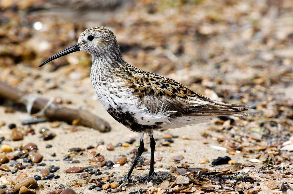 """Dunlin © 2009 C. M. Neri.  Whitefish Point, MI DUNLWP  <div class=""""ss-paypal-button""""><div class=""""ss-paypal-add-to-cart-section""""><div class=""""ss-paypal-product-options""""><h4>Mat Sizes</h4><ul><li><a href=""""https://www.paypal.com/cgi-bin/webscr?cmd=_cart&business=T77V5VKCW4K2U&lc=US&item_name=Dunlin%20%C2%A9%202009%20C.%20M.%20Neri.%20%20Whitefish%20Point%2C%20MI%20DUNLWP&item_number=http%3A%2F%2Fwww.nightflightimages.com%2FGalleries-1%2FShore%2Fi-XSPMB8N&button_subtype=products&no_note=0&cn=Add%20special%20instructions%20to%20the%20seller%3A&no_shipping=2&currency_code=USD&weight_unit=lbs&add=1&bn=PP-ShopCartBF%3Abtn_cart_SM.gif%3ANonHosted&on0=Mat%20Sizes&option_select0=5%20x%207&option_amount0=10.00&option_select1=8%20x%2010&option_amount1=18.00&option_select2=11%20x%2014&option_amount2=28.00&option_select3=card&option_amount3=4.00&option_index=0&charset=utf-8&submit=&os0=5%20x%207"""" target=""""paypal""""><span>5 x 7 $11.00 USD</span><img src=""""https://www.paypalobjects.com/en_US/i/btn/btn_cart_SM.gif""""></a></li><li><a href=""""https://www.paypal.com/cgi-bin/webscr?cmd=_cart&business=T77V5VKCW4K2U&lc=US&item_name=Dunlin%20%C2%A9%202009%20C.%20M.%20Neri.%20%20Whitefish%20Point%2C%20MI%20DUNLWP&item_number=http%3A%2F%2Fwww.nightflightimages.com%2FGalleries-1%2FShore%2Fi-XSPMB8N&button_subtype=products&no_note=0&cn=Add%20special%20instructions%20to%20the%20seller%3A&no_shipping=2&currency_code=USD&weight_unit=lbs&add=1&bn=PP-ShopCartBF%3Abtn_cart_SM.gif%3ANonHosted&on0=Mat%20Sizes&option_select0=5%20x%207&option_amount0=10.00&option_select1=8%20x%2010&option_amount1=18.00&option_select2=11%20x%2014&option_amount2=28.00&option_select3=card&option_amount3=4.00&option_index=0&charset=utf-8&submit=&os0=8%20x%2010"""" target=""""paypal""""><span>8 x 10 $19.00 USD</span><img src=""""https://www.paypalobjects.com/en_US/i/btn/btn_cart_SM.gif""""></a></li><li><a href=""""https://www.paypal.com/cgi-bin/webscr?cmd=_cart&business=T77V5VKCW4K2U&lc=US&item_name=Dunlin%20%C2%A9%202009%20C.%20M.%20Neri.%20%20Whitefi"""
