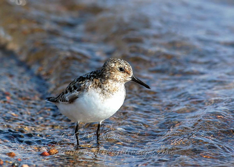 "White-rumped Sandpiper © 2007 C. M. Neri. Whitefish Point, MI  <div class=""ss-paypal-button""><div class=""ss-paypal-add-to-cart-section""><div class=""ss-paypal-product-options""><h4>Mat Sizes</h4><ul><li><a href=""https://www.paypal.com/cgi-bin/webscr?cmd=_cart&amp;business=T77V5VKCW4K2U&amp;lc=US&amp;item_name=White-rumped%20Sandpiper%20%C2%A9%202007%20C.%20M.%20Neri.%20Whitefish%20Point%2C%20MI&amp;item_number=http%3A%2F%2Fwww.nightflightimages.com%2FGalleries-1%2FShore%2Fi-Zj3zZpJ&amp;button_subtype=products&amp;no_note=0&amp;cn=Add%20special%20instructions%20to%20the%20seller%3A&amp;no_shipping=2&amp;currency_code=USD&amp;weight_unit=lbs&amp;add=1&amp;bn=PP-ShopCartBF%3Abtn_cart_SM.gif%3ANonHosted&amp;on0=Mat%20Sizes&amp;option_select0=5%20x%207&amp;option_amount0=10.00&amp;option_select1=8%20x%2010&amp;option_amount1=18.00&amp;option_select2=11%20x%2014&amp;option_amount2=28.00&amp;option_select3=card&amp;option_amount3=4.00&amp;option_index=0&amp;charset=utf-8&amp;submit=&amp;os0=5%20x%207"" target=""paypal""><span>5 x 7 $11.00 USD</span><img src=""https://www.paypalobjects.com/en_US/i/btn/btn_cart_SM.gif""></a></li><li><a href=""https://www.paypal.com/cgi-bin/webscr?cmd=_cart&amp;business=T77V5VKCW4K2U&amp;lc=US&amp;item_name=White-rumped%20Sandpiper%20%C2%A9%202007%20C.%20M.%20Neri.%20Whitefish%20Point%2C%20MI&amp;item_number=http%3A%2F%2Fwww.nightflightimages.com%2FGalleries-1%2FShore%2Fi-Zj3zZpJ&amp;button_subtype=products&amp;no_note=0&amp;cn=Add%20special%20instructions%20to%20the%20seller%3A&amp;no_shipping=2&amp;currency_code=USD&amp;weight_unit=lbs&amp;add=1&amp;bn=PP-ShopCartBF%3Abtn_cart_SM.gif%3ANonHosted&amp;on0=Mat%20Sizes&amp;option_select0=5%20x%207&amp;option_amount0=10.00&amp;option_select1=8%20x%2010&amp;option_amount1=18.00&amp;option_select2=11%20x%2014&amp;option_amount2=28.00&amp;option_select3=card&amp;option_amount3=4.00&amp;option_index=0&amp;charset=utf-8&amp;submit=&amp;os0=8%20x%2010"" target=""paypal""><span>8 x 10 $19.00 USD</span><img src=""https://www.paypalobjects.com/en_US/i/btn/btn_cart_SM.gif""></a></li><li><a href=""https://www.paypal.com/cgi-bin/webscr?cmd=_cart&amp;business=T77V5VKCW4K2U&amp;lc=US&amp;item_name=White-rumped%20Sandpiper%20%C2%A9%202007%20C.%20M.%20Neri.%20Whitefish%20Point%2C%20MI&amp;item_number=http%3A%2F%2Fwww.nightflightimages.com%2FGalleries-1%2FShore%2Fi-Zj3zZpJ&amp;button_subtype=products&amp;no_note=0&amp;cn=Add%20special%20instructions%20to%20the%20seller%3A&amp;no_shipping=2&amp;currency_code=USD&amp;weight_unit=lbs&amp;add=1&amp;bn=PP-ShopCartBF%3Abtn_cart_SM.gif%3ANonHosted&amp;on0=Mat%20Sizes&amp;option_select0=5%20x%207&amp;option_amount0=10.00&amp;option_select1=8%20x%2010&amp;option_amount1=18.00&amp;option_select2=11%20x%2014&amp;option_amount2=28.00&amp;option_select3=card&amp;option_amount3=4.00&amp;option_index=0&amp;charset=utf-8&amp;submit=&amp;os0=11%20x%2014"" target=""paypal""><span>11 x 14 $29.00 USD</span><img src=""https://www.paypalobjects.com/en_US/i/btn/btn_cart_SM.gif""></a></li><li><a href=""https://www.paypal.com/cgi-bin/webscr?cmd=_cart&amp;business=T77V5VKCW4K2U&amp;lc=US&amp;item_name=White-rumped%20Sandpiper%20%C2%A9%202007%20C.%20M.%20Neri.%20Whitefish%20Point%2C%20MI&amp;item_number=http%3A%2F%2Fwww.nightflightimages.com%2FGalleries-1%2FShore%2Fi-Zj3zZpJ&amp;button_subtype=products&amp;no_note=0&amp;cn=Add%20special%20instructions%20to%20the%20seller%3A&amp;no_shipping=2&amp;currency_code=USD&amp;weight_unit=lbs&amp;add=1&amp;bn=PP-ShopCartBF%3Abtn_cart_SM.gif%3ANonHosted&amp;on0=Mat%20Sizes&amp;option_select0=5%20x%207&amp;option_amount0=10.00&amp;option_select1=8%20x%2010&amp;option_amount1=18.00&amp;option_select2=11%20x%2014&amp;option_amount2=28.00&amp;option_select3=card&amp;option_amount3=4.00&amp;option_index=0&amp;charset=utf-8&amp;submit=&amp;os0=card"" target=""paypal""><span>card $5.00 USD</span><img src=""https://www.paypalobjects.com/en_US/i/btn/btn_cart_SM.gif""></a></li></ul></div></div> <div class=""ss-paypal-view-cart-section""><a href=""https://www.paypal.com/cgi-bin/webscr?cmd=_cart&amp;business=T77V5VKCW4K2U&amp;display=1&amp;item_name=White-rumped%20Sandpiper%20%C2%A9%202007%20C.%20M.%20Neri.%20Whitefish%20Point%2C%20MI&amp;item_number=http%3A%2F%2Fwww.nightflightimages.com%2FGalleries-1%2FShore%2Fi-Zj3zZpJ&amp;charset=utf-8&amp;submit="" target=""paypal"" class=""ss-paypal-submit-button""><img src=""https://www.paypalobjects.com/en_US/i/btn/btn_viewcart_LG.gif""></a></div></div><div class=""ss-paypal-button-end""></div>"