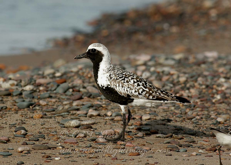 "Black-bellied Plover © 2008 C. M. Neri. Whitefish Point, MI BBPLSANDWP  <div class=""ss-paypal-button""><div class=""ss-paypal-add-to-cart-section""><div class=""ss-paypal-product-options""><h4>Mat Sizes</h4><ul><li><a href=""https://www.paypal.com/cgi-bin/webscr?cmd=_cart&business=T77V5VKCW4K2U&lc=US&item_name=Black-bellied%20Plover%20%C2%A9%202008%20C.%20M.%20Neri.%20Whitefish%20Point%2C%20MI%20BBPLSANDWP&item_number=http%3A%2F%2Fwww.nightflightimages.com%2FGalleries-1%2FShore%2Fi-jDrhCjF&button_subtype=products&no_note=0&cn=Add%20special%20instructions%20to%20the%20seller%3A&no_shipping=2&currency_code=USD&weight_unit=lbs&add=1&bn=PP-ShopCartBF%3Abtn_cart_SM.gif%3ANonHosted&on0=Mat%20Sizes&option_select0=5%20x%207&option_amount0=10.00&option_select1=8%20x%2010&option_amount1=18.00&option_select2=11%20x%2014&option_amount2=28.00&option_select3=card&option_amount3=4.00&option_index=0&charset=utf-8&submit=&os0=5%20x%207"" target=""paypal""><span>5 x 7 $11.00 USD</span><img src=""https://www.paypalobjects.com/en_US/i/btn/btn_cart_SM.gif""></a></li><li><a href=""https://www.paypal.com/cgi-bin/webscr?cmd=_cart&business=T77V5VKCW4K2U&lc=US&item_name=Black-bellied%20Plover%20%C2%A9%202008%20C.%20M.%20Neri.%20Whitefish%20Point%2C%20MI%20BBPLSANDWP&item_number=http%3A%2F%2Fwww.nightflightimages.com%2FGalleries-1%2FShore%2Fi-jDrhCjF&button_subtype=products&no_note=0&cn=Add%20special%20instructions%20to%20the%20seller%3A&no_shipping=2&currency_code=USD&weight_unit=lbs&add=1&bn=PP-ShopCartBF%3Abtn_cart_SM.gif%3ANonHosted&on0=Mat%20Sizes&option_select0=5%20x%207&option_amount0=10.00&option_select1=8%20x%2010&option_amount1=18.00&option_select2=11%20x%2014&option_amount2=28.00&option_select3=card&option_amount3=4.00&option_index=0&charset=utf-8&submit=&os0=8%20x%2010"" target=""paypal""><span>8 x 10 $19.00 USD</span><img src=""https://www.paypalobjects.com/en_US/i/btn/btn_cart_SM.gif""></a></li><li><a href=""https://www.paypal.com/cgi-bin/webscr?cmd=_cart&business=T77V5VKCW4K2U&lc=US&item_name=Black-bellied%20Plover%20%C2%A9%202008%20C.%20M.%20Neri.%20Whitefish%20Point%2C%20MI%20BBPLSANDWP&item_number=http%3A%2F%2Fwww.nightflightimages.com%2FGalleries-1%2FShore%2Fi-jDrhCjF&button_subtype=products&no_note=0&cn=Add%20special%20instructions%20to%20the%20seller%3A&no_shipping=2&currency_code=USD&weight_unit=lbs&add=1&bn=PP-ShopCartBF%3Abtn_cart_SM.gif%3ANonHosted&on0=Mat%20Sizes&option_select0=5%20x%207&option_amount0=10.00&option_select1=8%20x%2010&option_amount1=18.00&option_select2=11%20x%2014&option_amount2=28.00&option_select3=card&option_amount3=4.00&option_index=0&charset=utf-8&submit=&os0=11%20x%2014"" target=""paypal""><span>11 x 14 $29.00 USD</span><img src=""https://www.paypalobjects.com/en_US/i/btn/btn_cart_SM.gif""></a></li><li><a href=""https://www.paypal.com/cgi-bin/webscr?cmd=_cart&business=T77V5VKCW4K2U&lc=US&item_name=Black-bellied%20Plover%20%C2%A9%202008%20C.%20M.%20Neri.%20Whitefish%20Point%2C%20MI%20BBPLSANDWP&item_number=http%3A%2F%2Fwww.nightflightimages.com%2FGalleries-1%2FShore%2Fi-jDrhCjF&button_subtype=products&no_note=0&cn=Add%20special%20instructions%20to%20the%20seller%3A&no_shipping=2&currency_code=USD&weight_unit=lbs&add=1&bn=PP-ShopCartBF%3Abtn_cart_SM.gif%3ANonHosted&on0=Mat%20Sizes&option_select0=5%20x%207&option_amount0=10.00&option_select1=8%20x%2010&option_amount1=18.00&option_select2=11%20x%2014&option_amount2=28.00&option_select3=card&option_amount3=4.00&option_index=0&charset=utf-8&submit=&os0=card"" target=""paypal""><span>card $5.00 USD</span><img src=""https://www.paypalobjects.com/en_US/i/btn/btn_cart_SM.gif""></a></li></ul></div></div> <div class=""ss-paypal-view-cart-section""><a href=""https://www.paypal.com/cgi-bin/webscr?cmd=_cart&business=T77V5VKCW4K2U&display=1&item_name=Black-bellied%20Plover%20%C2%A9%202008%20C.%20M.%20Neri.%20Whitefish%20Point%2C%20MI%20BBPLSANDWP&item_number=http%3A%2F%2Fwww.nightflightimages.com%2FGalleries-1%2FShore%2Fi-jDrhCjF&charset=utf-8&submit="" target=""paypal"" class=""ss-paypal-submit-button""><img src=""https://www.paypalobjects.com/en_US/i/btn/btn_viewcart_LG.gif""></a></div></div><div class=""ss-paypal-button-end""></div>"