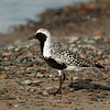 "Black-bellied Plover © 2008 C. M. Neri. Whitefish Point, MI BBPLSANDWP  <div class=""ss-paypal-button""><div class=""ss-paypal-add-to-cart-section""><div class=""ss-paypal-product-options""><h4>Mat Sizes</h4><ul><li><a href=""https://www.paypal.com/cgi-bin/webscr?cmd=_cart&amp;business=T77V5VKCW4K2U&amp;lc=US&amp;item_name=Black-bellied%20Plover%20%C2%A9%202008%20C.%20M.%20Neri.%20Whitefish%20Point%2C%20MI%20BBPLSANDWP&amp;item_number=http%3A%2F%2Fwww.nightflightimages.com%2FGalleries-1%2FShore%2Fi-jDrhCjF&amp;button_subtype=products&amp;no_note=0&amp;cn=Add%20special%20instructions%20to%20the%20seller%3A&amp;no_shipping=2&amp;currency_code=USD&amp;weight_unit=lbs&amp;add=1&amp;bn=PP-ShopCartBF%3Abtn_cart_SM.gif%3ANonHosted&amp;on0=Mat%20Sizes&amp;option_select0=5%20x%207&amp;option_amount0=10.00&amp;option_select1=8%20x%2010&amp;option_amount1=18.00&amp;option_select2=11%20x%2014&amp;option_amount2=28.00&amp;option_select3=card&amp;option_amount3=4.00&amp;option_index=0&amp;charset=utf-8&amp;submit=&amp;os0=5%20x%207"" target=""paypal""><span>5 x 7 $11.00 USD</span><img src=""https://www.paypalobjects.com/en_US/i/btn/btn_cart_SM.gif""></a></li><li><a href=""https://www.paypal.com/cgi-bin/webscr?cmd=_cart&amp;business=T77V5VKCW4K2U&amp;lc=US&amp;item_name=Black-bellied%20Plover%20%C2%A9%202008%20C.%20M.%20Neri.%20Whitefish%20Point%2C%20MI%20BBPLSANDWP&amp;item_number=http%3A%2F%2Fwww.nightflightimages.com%2FGalleries-1%2FShore%2Fi-jDrhCjF&amp;button_subtype=products&amp;no_note=0&amp;cn=Add%20special%20instructions%20to%20the%20seller%3A&amp;no_shipping=2&amp;currency_code=USD&amp;weight_unit=lbs&amp;add=1&amp;bn=PP-ShopCartBF%3Abtn_cart_SM.gif%3ANonHosted&amp;on0=Mat%20Sizes&amp;option_select0=5%20x%207&amp;option_amount0=10.00&amp;option_select1=8%20x%2010&amp;option_amount1=18.00&amp;option_select2=11%20x%2014&amp;option_amount2=28.00&amp;option_select3=card&amp;option_amount3=4.00&amp;option_index=0&amp;charset=utf-8&amp;submit=&amp;os0=8%20x%2010"" target=""paypal""><span>8 x 10 $19.00 USD</span><img src=""https://www.paypalobjects.com/en_US/i/btn/btn_cart_SM.gif""></a></li><li><a href=""https://www.paypal.com/cgi-bin/webscr?cmd=_cart&amp;business=T77V5VKCW4K2U&amp;lc=US&amp;item_name=Black-bellied%20Plover%20%C2%A9%202008%20C.%20M.%20Neri.%20Whitefish%20Point%2C%20MI%20BBPLSANDWP&amp;item_number=http%3A%2F%2Fwww.nightflightimages.com%2FGalleries-1%2FShore%2Fi-jDrhCjF&amp;button_subtype=products&amp;no_note=0&amp;cn=Add%20special%20instructions%20to%20the%20seller%3A&amp;no_shipping=2&amp;currency_code=USD&amp;weight_unit=lbs&amp;add=1&amp;bn=PP-ShopCartBF%3Abtn_cart_SM.gif%3ANonHosted&amp;on0=Mat%20Sizes&amp;option_select0=5%20x%207&amp;option_amount0=10.00&amp;option_select1=8%20x%2010&amp;option_amount1=18.00&amp;option_select2=11%20x%2014&amp;option_amount2=28.00&amp;option_select3=card&amp;option_amount3=4.00&amp;option_index=0&amp;charset=utf-8&amp;submit=&amp;os0=11%20x%2014"" target=""paypal""><span>11 x 14 $29.00 USD</span><img src=""https://www.paypalobjects.com/en_US/i/btn/btn_cart_SM.gif""></a></li><li><a href=""https://www.paypal.com/cgi-bin/webscr?cmd=_cart&amp;business=T77V5VKCW4K2U&amp;lc=US&amp;item_name=Black-bellied%20Plover%20%C2%A9%202008%20C.%20M.%20Neri.%20Whitefish%20Point%2C%20MI%20BBPLSANDWP&amp;item_number=http%3A%2F%2Fwww.nightflightimages.com%2FGalleries-1%2FShore%2Fi-jDrhCjF&amp;button_subtype=products&amp;no_note=0&amp;cn=Add%20special%20instructions%20to%20the%20seller%3A&amp;no_shipping=2&amp;currency_code=USD&amp;weight_unit=lbs&amp;add=1&amp;bn=PP-ShopCartBF%3Abtn_cart_SM.gif%3ANonHosted&amp;on0=Mat%20Sizes&amp;option_select0=5%20x%207&amp;option_amount0=10.00&amp;option_select1=8%20x%2010&amp;option_amount1=18.00&amp;option_select2=11%20x%2014&amp;option_amount2=28.00&amp;option_select3=card&amp;option_amount3=4.00&amp;option_index=0&amp;charset=utf-8&amp;submit=&amp;os0=card"" target=""paypal""><span>card $5.00 USD</span><img src=""https://www.paypalobjects.com/en_US/i/btn/btn_cart_SM.gif""></a></li></ul></div></div> <div class=""ss-paypal-view-cart-section""><a href=""https://www.paypal.com/cgi-bin/webscr?cmd=_cart&amp;business=T77V5VKCW4K2U&amp;display=1&amp;item_name=Black-bellied%20Plover%20%C2%A9%202008%20C.%20M.%20Neri.%20Whitefish%20Point%2C%20MI%20BBPLSANDWP&amp;item_number=http%3A%2F%2Fwww.nightflightimages.com%2FGalleries-1%2FShore%2Fi-jDrhCjF&amp;charset=utf-8&amp;submit="" target=""paypal"" class=""ss-paypal-submit-button""><img src=""https://www.paypalobjects.com/en_US/i/btn/btn_viewcart_LG.gif""></a></div></div><div class=""ss-paypal-button-end""></div>"