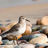 "White-rumped Sandpiper © 2009 C. M. Neri. Whitefish Point, MI WRSA09  <div class=""ss-paypal-button""><div class=""ss-paypal-add-to-cart-section""><div class=""ss-paypal-product-options""><h4>Mat Sizes</h4><ul><li><a href=""https://www.paypal.com/cgi-bin/webscr?cmd=_cart&business=T77V5VKCW4K2U&lc=US&item_name=White-rumped%20Sandpiper%20%C2%A9%202009%20C.%20M.%20Neri.%20Whitefish%20Point%2C%20MI%20WRSA09&item_number=http%3A%2F%2Fwww.nightflightimages.com%2FGalleries-1%2FShore%2Fi-qhZQHqK&button_subtype=products&no_note=0&cn=Add%20special%20instructions%20to%20the%20seller%3A&no_shipping=2&currency_code=USD&weight_unit=lbs&add=1&bn=PP-ShopCartBF%3Abtn_cart_SM.gif%3ANonHosted&on0=Mat%20Sizes&option_select0=5%20x%207&option_amount0=10.00&option_select1=8%20x%2010&option_amount1=18.00&option_select2=11%20x%2014&option_amount2=28.00&option_select3=card&option_amount3=4.00&option_index=0&charset=utf-8&submit=&os0=5%20x%207"" target=""paypal""><span>5 x 7 $11.00 USD</span><img src=""https://www.paypalobjects.com/en_US/i/btn/btn_cart_SM.gif""></a></li><li><a href=""https://www.paypal.com/cgi-bin/webscr?cmd=_cart&business=T77V5VKCW4K2U&lc=US&item_name=White-rumped%20Sandpiper%20%C2%A9%202009%20C.%20M.%20Neri.%20Whitefish%20Point%2C%20MI%20WRSA09&item_number=http%3A%2F%2Fwww.nightflightimages.com%2FGalleries-1%2FShore%2Fi-qhZQHqK&button_subtype=products&no_note=0&cn=Add%20special%20instructions%20to%20the%20seller%3A&no_shipping=2&currency_code=USD&weight_unit=lbs&add=1&bn=PP-ShopCartBF%3Abtn_cart_SM.gif%3ANonHosted&on0=Mat%20Sizes&option_select0=5%20x%207&option_amount0=10.00&option_select1=8%20x%2010&option_amount1=18.00&option_select2=11%20x%2014&option_amount2=28.00&option_select3=card&option_amount3=4.00&option_index=0&charset=utf-8&submit=&os0=8%20x%2010"" target=""paypal""><span>8 x 10 $19.00 USD</span><img src=""https://www.paypalobjects.com/en_US/i/btn/btn_cart_SM.gif""></a></li><li><a href=""https://www.paypal.com/cgi-bin/webscr?cmd=_cart&business=T77V5VKCW4K2U&lc=US&item_name=White-rumped%20Sandpiper%20%C2%A9%202009%20C.%20M.%20Neri.%20Whitefish%20Point%2C%20MI%20WRSA09&item_number=http%3A%2F%2Fwww.nightflightimages.com%2FGalleries-1%2FShore%2Fi-qhZQHqK&button_subtype=products&no_note=0&cn=Add%20special%20instructions%20to%20the%20seller%3A&no_shipping=2&currency_code=USD&weight_unit=lbs&add=1&bn=PP-ShopCartBF%3Abtn_cart_SM.gif%3ANonHosted&on0=Mat%20Sizes&option_select0=5%20x%207&option_amount0=10.00&option_select1=8%20x%2010&option_amount1=18.00&option_select2=11%20x%2014&option_amount2=28.00&option_select3=card&option_amount3=4.00&option_index=0&charset=utf-8&submit=&os0=11%20x%2014"" target=""paypal""><span>11 x 14 $29.00 USD</span><img src=""https://www.paypalobjects.com/en_US/i/btn/btn_cart_SM.gif""></a></li><li><a href=""https://www.paypal.com/cgi-bin/webscr?cmd=_cart&business=T77V5VKCW4K2U&lc=US&item_name=White-rumped%20Sandpiper%20%C2%A9%202009%20C.%20M.%20Neri.%20Whitefish%20Point%2C%20MI%20WRSA09&item_number=http%3A%2F%2Fwww.nightflightimages.com%2FGalleries-1%2FShore%2Fi-qhZQHqK&button_subtype=products&no_note=0&cn=Add%20special%20instructions%20to%20the%20seller%3A&no_shipping=2&currency_code=USD&weight_unit=lbs&add=1&bn=PP-ShopCartBF%3Abtn_cart_SM.gif%3ANonHosted&on0=Mat%20Sizes&option_select0=5%20x%207&option_amount0=10.00&option_select1=8%20x%2010&option_amount1=18.00&option_select2=11%20x%2014&option_amount2=28.00&option_select3=card&option_amount3=4.00&option_index=0&charset=utf-8&submit=&os0=card"" target=""paypal""><span>card $5.00 USD</span><img src=""https://www.paypalobjects.com/en_US/i/btn/btn_cart_SM.gif""></a></li></ul></div></div> <div class=""ss-paypal-view-cart-section""><a href=""https://www.paypal.com/cgi-bin/webscr?cmd=_cart&business=T77V5VKCW4K2U&display=1&item_name=White-rumped%20Sandpiper%20%C2%A9%202009%20C.%20M.%20Neri.%20Whitefish%20Point%2C%20MI%20WRSA09&item_number=http%3A%2F%2Fwww.nightflightimages.com%2FGalleries-1%2FShore%2Fi-qhZQHqK&charset=utf-8&submit="" target=""paypal"" class=""ss-paypal-submit-button""><img src=""https://www.paypalobjects.com/en_US/i/btn/btn_viewcart_LG.gif""></a></div></div><div class=""ss-paypal-button-end""></div>"