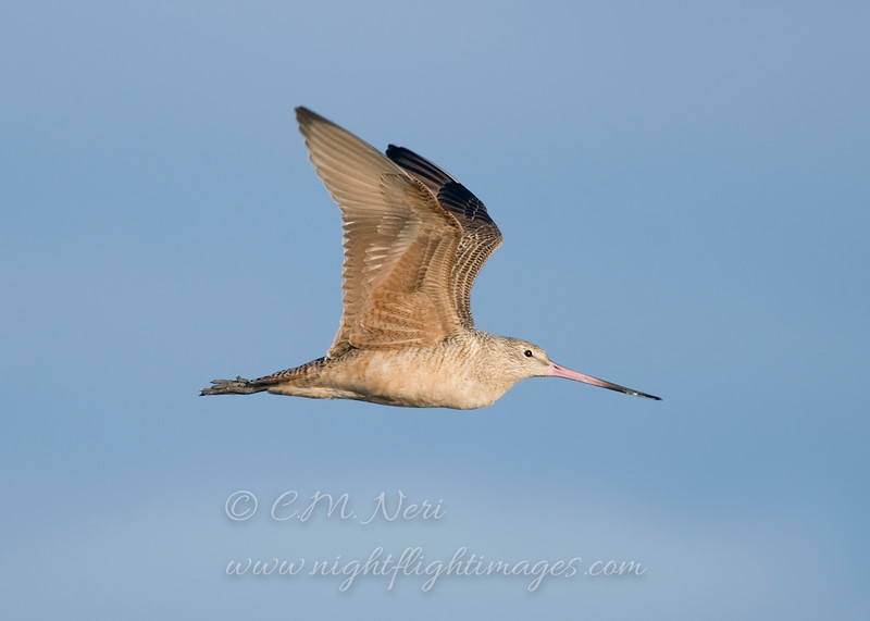 "Marbled Godwit © 2010 C. M. Neri.  Arcata Marsh, CA MAGOCA  <div class=""ss-paypal-button""><div class=""ss-paypal-add-to-cart-section""><div class=""ss-paypal-product-options""><h4>Mat Sizes</h4><ul><li><a href=""https://www.paypal.com/cgi-bin/webscr?cmd=_cart&amp;business=T77V5VKCW4K2U&amp;lc=US&amp;item_name=Marbled%20Godwit%20%C2%A9%202010%20C.%20M.%20Neri.%20%20Arcata%20Marsh%2C%20CA%20MAGOCA&amp;item_number=http%3A%2F%2Fwww.nightflightimages.com%2FGalleries-1%2FShore%2Fi-rjrQcCC&amp;button_subtype=products&amp;no_note=0&amp;cn=Add%20special%20instructions%20to%20the%20seller%3A&amp;no_shipping=2&amp;currency_code=USD&amp;weight_unit=lbs&amp;add=1&amp;bn=PP-ShopCartBF%3Abtn_cart_SM.gif%3ANonHosted&amp;on0=Mat%20Sizes&amp;option_select0=5%20x%207&amp;option_amount0=10.00&amp;option_select1=8%20x%2010&amp;option_amount1=18.00&amp;option_select2=11%20x%2014&amp;option_amount2=28.00&amp;option_select3=card&amp;option_amount3=4.00&amp;option_index=0&amp;charset=utf-8&amp;submit=&amp;os0=5%20x%207"" target=""paypal""><span>5 x 7 $11.00 USD</span><img src=""https://www.paypalobjects.com/en_US/i/btn/btn_cart_SM.gif""></a></li><li><a href=""https://www.paypal.com/cgi-bin/webscr?cmd=_cart&amp;business=T77V5VKCW4K2U&amp;lc=US&amp;item_name=Marbled%20Godwit%20%C2%A9%202010%20C.%20M.%20Neri.%20%20Arcata%20Marsh%2C%20CA%20MAGOCA&amp;item_number=http%3A%2F%2Fwww.nightflightimages.com%2FGalleries-1%2FShore%2Fi-rjrQcCC&amp;button_subtype=products&amp;no_note=0&amp;cn=Add%20special%20instructions%20to%20the%20seller%3A&amp;no_shipping=2&amp;currency_code=USD&amp;weight_unit=lbs&amp;add=1&amp;bn=PP-ShopCartBF%3Abtn_cart_SM.gif%3ANonHosted&amp;on0=Mat%20Sizes&amp;option_select0=5%20x%207&amp;option_amount0=10.00&amp;option_select1=8%20x%2010&amp;option_amount1=18.00&amp;option_select2=11%20x%2014&amp;option_amount2=28.00&amp;option_select3=card&amp;option_amount3=4.00&amp;option_index=0&amp;charset=utf-8&amp;submit=&amp;os0=8%20x%2010"" target=""paypal""><span>8 x 10 $19.00 USD</span><img src=""https://www.paypalobjects.com/en_US/i/btn/btn_cart_SM.gif""></a></li><li><a href=""https://www.paypal.com/cgi-bin/webscr?cmd=_cart&amp;business=T77V5VKCW4K2U&amp;lc=US&amp;item_name=Marbled%20Godwit%20%C2%A9%202010%20C.%20M.%20Neri.%20%20Arcata%20Marsh%2C%20CA%20MAGOCA&amp;item_number=http%3A%2F%2Fwww.nightflightimages.com%2FGalleries-1%2FShore%2Fi-rjrQcCC&amp;button_subtype=products&amp;no_note=0&amp;cn=Add%20special%20instructions%20to%20the%20seller%3A&amp;no_shipping=2&amp;currency_code=USD&amp;weight_unit=lbs&amp;add=1&amp;bn=PP-ShopCartBF%3Abtn_cart_SM.gif%3ANonHosted&amp;on0=Mat%20Sizes&amp;option_select0=5%20x%207&amp;option_amount0=10.00&amp;option_select1=8%20x%2010&amp;option_amount1=18.00&amp;option_select2=11%20x%2014&amp;option_amount2=28.00&amp;option_select3=card&amp;option_amount3=4.00&amp;option_index=0&amp;charset=utf-8&amp;submit=&amp;os0=11%20x%2014"" target=""paypal""><span>11 x 14 $29.00 USD</span><img src=""https://www.paypalobjects.com/en_US/i/btn/btn_cart_SM.gif""></a></li><li><a href=""https://www.paypal.com/cgi-bin/webscr?cmd=_cart&amp;business=T77V5VKCW4K2U&amp;lc=US&amp;item_name=Marbled%20Godwit%20%C2%A9%202010%20C.%20M.%20Neri.%20%20Arcata%20Marsh%2C%20CA%20MAGOCA&amp;item_number=http%3A%2F%2Fwww.nightflightimages.com%2FGalleries-1%2FShore%2Fi-rjrQcCC&amp;button_subtype=products&amp;no_note=0&amp;cn=Add%20special%20instructions%20to%20the%20seller%3A&amp;no_shipping=2&amp;currency_code=USD&amp;weight_unit=lbs&amp;add=1&amp;bn=PP-ShopCartBF%3Abtn_cart_SM.gif%3ANonHosted&amp;on0=Mat%20Sizes&amp;option_select0=5%20x%207&amp;option_amount0=10.00&amp;option_select1=8%20x%2010&amp;option_amount1=18.00&amp;option_select2=11%20x%2014&amp;option_amount2=28.00&amp;option_select3=card&amp;option_amount3=4.00&amp;option_index=0&amp;charset=utf-8&amp;submit=&amp;os0=card"" target=""paypal""><span>card $5.00 USD</span><img src=""https://www.paypalobjects.com/en_US/i/btn/btn_cart_SM.gif""></a></li></ul></div></div> <div class=""ss-paypal-view-cart-section""><a href=""https://www.paypal.com/cgi-bin/webscr?cmd=_cart&amp;business=T77V5VKCW4K2U&amp;display=1&amp;item_name=Marbled%20Godwit%20%C2%A9%202010%20C.%20M.%20Neri.%20%20Arcata%20Marsh%2C%20CA%20MAGOCA&amp;item_number=http%3A%2F%2Fwww.nightflightimages.com%2FGalleries-1%2FShore%2Fi-rjrQcCC&amp;charset=utf-8&amp;submit="" target=""paypal"" class=""ss-paypal-submit-button""><img src=""https://www.paypalobjects.com/en_US/i/btn/btn_viewcart_LG.gif""></a></div></div><div class=""ss-paypal-button-end""></div>"