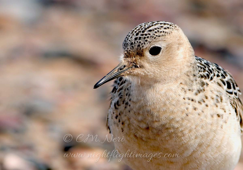 "Buff-breasted Sandpiper © 2008 C. M. Neri. Whitefish Point, MI BBSAHS  <div class=""ss-paypal-button""><div class=""ss-paypal-add-to-cart-section""><div class=""ss-paypal-product-options""><h4>Mat Sizes</h4><ul><li><a href=""https://www.paypal.com/cgi-bin/webscr?cmd=_cart&amp;business=T77V5VKCW4K2U&amp;lc=US&amp;item_name=Buff-breasted%20Sandpiper%20%C2%A9%202008%20C.%20M.%20Neri.%20Whitefish%20Point%2C%20MI%20BBSAHS&amp;item_number=http%3A%2F%2Fwww.nightflightimages.com%2FGalleries-1%2FShore%2Fi-ztzTsZZ&amp;button_subtype=products&amp;no_note=0&amp;cn=Add%20special%20instructions%20to%20the%20seller%3A&amp;no_shipping=2&amp;currency_code=USD&amp;weight_unit=lbs&amp;add=1&amp;bn=PP-ShopCartBF%3Abtn_cart_SM.gif%3ANonHosted&amp;on0=Mat%20Sizes&amp;option_select0=5%20x%207&amp;option_amount0=10.00&amp;option_select1=8%20x%2010&amp;option_amount1=18.00&amp;option_select2=11%20x%2014&amp;option_amount2=28.00&amp;option_select3=card&amp;option_amount3=4.00&amp;option_index=0&amp;charset=utf-8&amp;submit=&amp;os0=5%20x%207"" target=""paypal""><span>5 x 7 $11.00 USD</span><img src=""https://www.paypalobjects.com/en_US/i/btn/btn_cart_SM.gif""></a></li><li><a href=""https://www.paypal.com/cgi-bin/webscr?cmd=_cart&amp;business=T77V5VKCW4K2U&amp;lc=US&amp;item_name=Buff-breasted%20Sandpiper%20%C2%A9%202008%20C.%20M.%20Neri.%20Whitefish%20Point%2C%20MI%20BBSAHS&amp;item_number=http%3A%2F%2Fwww.nightflightimages.com%2FGalleries-1%2FShore%2Fi-ztzTsZZ&amp;button_subtype=products&amp;no_note=0&amp;cn=Add%20special%20instructions%20to%20the%20seller%3A&amp;no_shipping=2&amp;currency_code=USD&amp;weight_unit=lbs&amp;add=1&amp;bn=PP-ShopCartBF%3Abtn_cart_SM.gif%3ANonHosted&amp;on0=Mat%20Sizes&amp;option_select0=5%20x%207&amp;option_amount0=10.00&amp;option_select1=8%20x%2010&amp;option_amount1=18.00&amp;option_select2=11%20x%2014&amp;option_amount2=28.00&amp;option_select3=card&amp;option_amount3=4.00&amp;option_index=0&amp;charset=utf-8&amp;submit=&amp;os0=8%20x%2010"" target=""paypal""><span>8 x 10 $19.00 USD</span><img src=""https://www.paypalobjects.com/en_US/i/btn/btn_cart_SM.gif""></a></li><li><a href=""https://www.paypal.com/cgi-bin/webscr?cmd=_cart&amp;business=T77V5VKCW4K2U&amp;lc=US&amp;item_name=Buff-breasted%20Sandpiper%20%C2%A9%202008%20C.%20M.%20Neri.%20Whitefish%20Point%2C%20MI%20BBSAHS&amp;item_number=http%3A%2F%2Fwww.nightflightimages.com%2FGalleries-1%2FShore%2Fi-ztzTsZZ&amp;button_subtype=products&amp;no_note=0&amp;cn=Add%20special%20instructions%20to%20the%20seller%3A&amp;no_shipping=2&amp;currency_code=USD&amp;weight_unit=lbs&amp;add=1&amp;bn=PP-ShopCartBF%3Abtn_cart_SM.gif%3ANonHosted&amp;on0=Mat%20Sizes&amp;option_select0=5%20x%207&amp;option_amount0=10.00&amp;option_select1=8%20x%2010&amp;option_amount1=18.00&amp;option_select2=11%20x%2014&amp;option_amount2=28.00&amp;option_select3=card&amp;option_amount3=4.00&amp;option_index=0&amp;charset=utf-8&amp;submit=&amp;os0=11%20x%2014"" target=""paypal""><span>11 x 14 $29.00 USD</span><img src=""https://www.paypalobjects.com/en_US/i/btn/btn_cart_SM.gif""></a></li><li><a href=""https://www.paypal.com/cgi-bin/webscr?cmd=_cart&amp;business=T77V5VKCW4K2U&amp;lc=US&amp;item_name=Buff-breasted%20Sandpiper%20%C2%A9%202008%20C.%20M.%20Neri.%20Whitefish%20Point%2C%20MI%20BBSAHS&amp;item_number=http%3A%2F%2Fwww.nightflightimages.com%2FGalleries-1%2FShore%2Fi-ztzTsZZ&amp;button_subtype=products&amp;no_note=0&amp;cn=Add%20special%20instructions%20to%20the%20seller%3A&amp;no_shipping=2&amp;currency_code=USD&amp;weight_unit=lbs&amp;add=1&amp;bn=PP-ShopCartBF%3Abtn_cart_SM.gif%3ANonHosted&amp;on0=Mat%20Sizes&amp;option_select0=5%20x%207&amp;option_amount0=10.00&amp;option_select1=8%20x%2010&amp;option_amount1=18.00&amp;option_select2=11%20x%2014&amp;option_amount2=28.00&amp;option_select3=card&amp;option_amount3=4.00&amp;option_index=0&amp;charset=utf-8&amp;submit=&amp;os0=card"" target=""paypal""><span>card $5.00 USD</span><img src=""https://www.paypalobjects.com/en_US/i/btn/btn_cart_SM.gif""></a></li></ul></div></div> <div class=""ss-paypal-view-cart-section""><a href=""https://www.paypal.com/cgi-bin/webscr?cmd=_cart&amp;business=T77V5VKCW4K2U&amp;display=1&amp;item_name=Buff-breasted%20Sandpiper%20%C2%A9%202008%20C.%20M.%20Neri.%20Whitefish%20Point%2C%20MI%20BBSAHS&amp;item_number=http%3A%2F%2Fwww.nightflightimages.com%2FGalleries-1%2FShore%2Fi-ztzTsZZ&amp;charset=utf-8&amp;submit="" target=""paypal"" class=""ss-paypal-submit-button""><img src=""https://www.paypalobjects.com/en_US/i/btn/btn_viewcart_LG.gif""></a></div></div><div class=""ss-paypal-button-end""></div>"